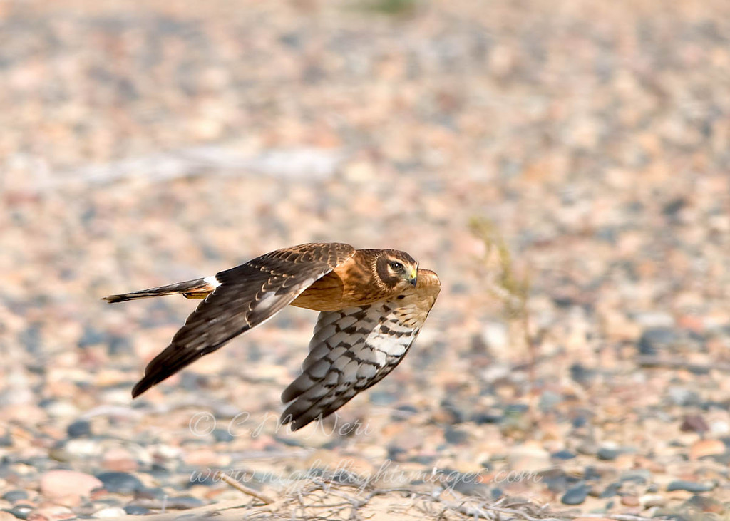 """Northern Harrier © 2008 C. M. Neri Whitefish Point, MI NOHAWP  <div class=""""ss-paypal-button""""><div class=""""ss-paypal-add-to-cart-section""""><div class=""""ss-paypal-product-options""""><h4>Mat Sizes</h4><ul><li><a href=""""https://www.paypal.com/cgi-bin/webscr?cmd=_cart&business=T77V5VKCW4K2U&lc=US&item_name=Northern%20Harrier%20%C2%A9%202008%20C.%20M.%20Neri%20Whitefish%20Point%2C%20MI%20NOHAWP&item_number=http%3A%2F%2Fwww.nightflightimages.com%2FGalleries-1%2FHawks%2Fi-2H94HSb&button_subtype=products&no_note=0&cn=Add%20special%20instructions%20to%20the%20seller%3A&no_shipping=2&currency_code=USD&weight_unit=lbs&add=1&bn=PP-ShopCartBF%3Abtn_cart_SM.gif%3ANonHosted&on0=Mat%20Sizes&option_select0=5%20x%207&option_amount0=10.00&option_select1=8%20x%2010&option_amount1=18.00&option_select2=11%20x%2014&option_amount2=28.00&option_select3=card&option_amount3=4.00&option_index=0&charset=utf-8&submit=&os0=5%20x%207"""" target=""""paypal""""><span>5 x 7 $11.00 USD</span><img src=""""https://www.paypalobjects.com/en_US/i/btn/btn_cart_SM.gif""""></a></li><li><a href=""""https://www.paypal.com/cgi-bin/webscr?cmd=_cart&business=T77V5VKCW4K2U&lc=US&item_name=Northern%20Harrier%20%C2%A9%202008%20C.%20M.%20Neri%20Whitefish%20Point%2C%20MI%20NOHAWP&item_number=http%3A%2F%2Fwww.nightflightimages.com%2FGalleries-1%2FHawks%2Fi-2H94HSb&button_subtype=products&no_note=0&cn=Add%20special%20instructions%20to%20the%20seller%3A&no_shipping=2&currency_code=USD&weight_unit=lbs&add=1&bn=PP-ShopCartBF%3Abtn_cart_SM.gif%3ANonHosted&on0=Mat%20Sizes&option_select0=5%20x%207&option_amount0=10.00&option_select1=8%20x%2010&option_amount1=18.00&option_select2=11%20x%2014&option_amount2=28.00&option_select3=card&option_amount3=4.00&option_index=0&charset=utf-8&submit=&os0=8%20x%2010"""" target=""""paypal""""><span>8 x 10 $19.00 USD</span><img src=""""https://www.paypalobjects.com/en_US/i/btn/btn_cart_SM.gif""""></a></li><li><a href=""""https://www.paypal.com/cgi-bin/webscr?cmd=_cart&business=T77V5VKCW4K2U&lc=US&item_name=Northern%20Harrier%20%C2%A9%2"""