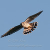 "American Kestrel © 2013 C. M. Neri.  Hawk Ridge, MN AMKEHR2  <div class=""ss-paypal-button""><div class=""ss-paypal-add-to-cart-section""><div class=""ss-paypal-product-options""><h4>Mat Sizes</h4><ul><li><a href=""https://www.paypal.com/cgi-bin/webscr?cmd=_cart&business=T77V5VKCW4K2U&lc=US&item_name=American%20Kestrel%20%C2%A9%202013%20C.%20M.%20Neri.%20%20Hawk%20Ridge%2C%20MN%20AMKEHR2&item_number=http%3A%2F%2Fwww.nightflightimages.com%2FGalleries-1%2FHawks%2Fi-9KpXsNj&button_subtype=products&no_note=0&cn=Add%20special%20instructions%20to%20the%20seller%3A&no_shipping=2&currency_code=USD&weight_unit=lbs&add=1&bn=PP-ShopCartBF%3Abtn_cart_SM.gif%3ANonHosted&on0=Mat%20Sizes&option_select0=5%20x%207&option_amount0=10.00&option_select1=8%20x%2010&option_amount1=18.00&option_select2=11%20x%2014&option_amount2=28.00&option_select3=card&option_amount3=4.00&option_index=0&charset=utf-8&submit=&os0=5%20x%207"" target=""paypal""><span>5 x 7 $11.00 USD</span><img src=""https://www.paypalobjects.com/en_US/i/btn/btn_cart_SM.gif""></a></li><li><a href=""https://www.paypal.com/cgi-bin/webscr?cmd=_cart&business=T77V5VKCW4K2U&lc=US&item_name=American%20Kestrel%20%C2%A9%202013%20C.%20M.%20Neri.%20%20Hawk%20Ridge%2C%20MN%20AMKEHR2&item_number=http%3A%2F%2Fwww.nightflightimages.com%2FGalleries-1%2FHawks%2Fi-9KpXsNj&button_subtype=products&no_note=0&cn=Add%20special%20instructions%20to%20the%20seller%3A&no_shipping=2&currency_code=USD&weight_unit=lbs&add=1&bn=PP-ShopCartBF%3Abtn_cart_SM.gif%3ANonHosted&on0=Mat%20Sizes&option_select0=5%20x%207&option_amount0=10.00&option_select1=8%20x%2010&option_amount1=18.00&option_select2=11%20x%2014&option_amount2=28.00&option_select3=card&option_amount3=4.00&option_index=0&charset=utf-8&submit=&os0=8%20x%2010"" target=""paypal""><span>8 x 10 $19.00 USD</span><img src=""https://www.paypalobjects.com/en_US/i/btn/btn_cart_SM.gif""></a></li><li><a href=""https://www.paypal.com/cgi-bin/webscr?cmd=_cart&business=T77V5VKCW4K2U&lc=US&item_name=American%20Kestrel%20%C2%A9%202013%20C.%20M.%20Neri.%20%20Hawk%20Ridge%2C%20MN%20AMKEHR2&item_number=http%3A%2F%2Fwww.nightflightimages.com%2FGalleries-1%2FHawks%2Fi-9KpXsNj&button_subtype=products&no_note=0&cn=Add%20special%20instructions%20to%20the%20seller%3A&no_shipping=2&currency_code=USD&weight_unit=lbs&add=1&bn=PP-ShopCartBF%3Abtn_cart_SM.gif%3ANonHosted&on0=Mat%20Sizes&option_select0=5%20x%207&option_amount0=10.00&option_select1=8%20x%2010&option_amount1=18.00&option_select2=11%20x%2014&option_amount2=28.00&option_select3=card&option_amount3=4.00&option_index=0&charset=utf-8&submit=&os0=11%20x%2014"" target=""paypal""><span>11 x 14 $29.00 USD</span><img src=""https://www.paypalobjects.com/en_US/i/btn/btn_cart_SM.gif""></a></li><li><a href=""https://www.paypal.com/cgi-bin/webscr?cmd=_cart&business=T77V5VKCW4K2U&lc=US&item_name=American%20Kestrel%20%C2%A9%202013%20C.%20M.%20Neri.%20%20Hawk%20Ridge%2C%20MN%20AMKEHR2&item_number=http%3A%2F%2Fwww.nightflightimages.com%2FGalleries-1%2FHawks%2Fi-9KpXsNj&button_subtype=products&no_note=0&cn=Add%20special%20instructions%20to%20the%20seller%3A&no_shipping=2&currency_code=USD&weight_unit=lbs&add=1&bn=PP-ShopCartBF%3Abtn_cart_SM.gif%3ANonHosted&on0=Mat%20Sizes&option_select0=5%20x%207&option_amount0=10.00&option_select1=8%20x%2010&option_amount1=18.00&option_select2=11%20x%2014&option_amount2=28.00&option_select3=card&option_amount3=4.00&option_index=0&charset=utf-8&submit=&os0=card"" target=""paypal""><span>card $5.00 USD</span><img src=""https://www.paypalobjects.com/en_US/i/btn/btn_cart_SM.gif""></a></li></ul></div></div> <div class=""ss-paypal-view-cart-section""><a href=""https://www.paypal.com/cgi-bin/webscr?cmd=_cart&business=T77V5VKCW4K2U&display=1&item_name=American%20Kestrel%20%C2%A9%202013%20C.%20M.%20Neri.%20%20Hawk%20Ridge%2C%20MN%20AMKEHR2&item_number=http%3A%2F%2Fwww.nightflightimages.com%2FGalleries-1%2FHawks%2Fi-9KpXsNj&charset=utf-8&submit="" target=""paypal"" class=""ss-paypal-submit-button""><img src=""https://www.paypalobjects.com/en_US/i/btn/btn_viewcart_LG.gif""></a></div></div><div class=""ss-paypal-button-end""></div>"