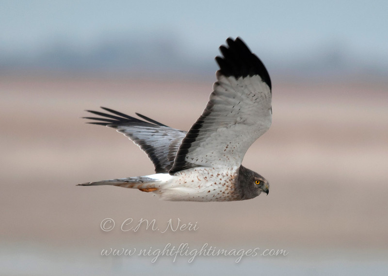 "Northern Harrier © 2013 C. M. Neri Antelope Island, UT NOHAUT  <div class=""ss-paypal-button""><div class=""ss-paypal-add-to-cart-section""><div class=""ss-paypal-product-options""><h4>Mat Sizes</h4><ul><li><a href=""https://www.paypal.com/cgi-bin/webscr?cmd=_cart&amp;business=T77V5VKCW4K2U&amp;lc=US&amp;item_name=Northern%20Harrier%20%C2%A9%202013%20C.%20M.%20Neri%20Antelope%20Island%2C%20UT%20NOHAUT&amp;item_number=http%3A%2F%2Fwww.nightflightimages.com%2FGalleries-1%2FHawks%2Fi-9Q7J8t6&amp;button_subtype=products&amp;no_note=0&amp;cn=Add%20special%20instructions%20to%20the%20seller%3A&amp;no_shipping=2&amp;currency_code=USD&amp;weight_unit=lbs&amp;add=1&amp;bn=PP-ShopCartBF%3Abtn_cart_SM.gif%3ANonHosted&amp;on0=Mat%20Sizes&amp;option_select0=5%20x%207&amp;option_amount0=10.00&amp;option_select1=8%20x%2010&amp;option_amount1=18.00&amp;option_select2=11%20x%2014&amp;option_amount2=28.00&amp;option_select3=card&amp;option_amount3=4.00&amp;option_index=0&amp;charset=utf-8&amp;submit=&amp;os0=5%20x%207"" target=""paypal""><span>5 x 7 $11.00 USD</span><img src=""https://www.paypalobjects.com/en_US/i/btn/btn_cart_SM.gif""></a></li><li><a href=""https://www.paypal.com/cgi-bin/webscr?cmd=_cart&amp;business=T77V5VKCW4K2U&amp;lc=US&amp;item_name=Northern%20Harrier%20%C2%A9%202013%20C.%20M.%20Neri%20Antelope%20Island%2C%20UT%20NOHAUT&amp;item_number=http%3A%2F%2Fwww.nightflightimages.com%2FGalleries-1%2FHawks%2Fi-9Q7J8t6&amp;button_subtype=products&amp;no_note=0&amp;cn=Add%20special%20instructions%20to%20the%20seller%3A&amp;no_shipping=2&amp;currency_code=USD&amp;weight_unit=lbs&amp;add=1&amp;bn=PP-ShopCartBF%3Abtn_cart_SM.gif%3ANonHosted&amp;on0=Mat%20Sizes&amp;option_select0=5%20x%207&amp;option_amount0=10.00&amp;option_select1=8%20x%2010&amp;option_amount1=18.00&amp;option_select2=11%20x%2014&amp;option_amount2=28.00&amp;option_select3=card&amp;option_amount3=4.00&amp;option_index=0&amp;charset=utf-8&amp;submit=&amp;os0=8%20x%2010"" target=""paypal""><span>8 x 10 $19.00 USD</span><img src=""https://www.paypalobjects.com/en_US/i/btn/btn_cart_SM.gif""></a></li><li><a href=""https://www.paypal.com/cgi-bin/webscr?cmd=_cart&amp;business=T77V5VKCW4K2U&amp;lc=US&amp;item_name=Northern%20Harrier%20%C2%A9%202013%20C.%20M.%20Neri%20Antelope%20Island%2C%20UT%20NOHAUT&amp;item_number=http%3A%2F%2Fwww.nightflightimages.com%2FGalleries-1%2FHawks%2Fi-9Q7J8t6&amp;button_subtype=products&amp;no_note=0&amp;cn=Add%20special%20instructions%20to%20the%20seller%3A&amp;no_shipping=2&amp;currency_code=USD&amp;weight_unit=lbs&amp;add=1&amp;bn=PP-ShopCartBF%3Abtn_cart_SM.gif%3ANonHosted&amp;on0=Mat%20Sizes&amp;option_select0=5%20x%207&amp;option_amount0=10.00&amp;option_select1=8%20x%2010&amp;option_amount1=18.00&amp;option_select2=11%20x%2014&amp;option_amount2=28.00&amp;option_select3=card&amp;option_amount3=4.00&amp;option_index=0&amp;charset=utf-8&amp;submit=&amp;os0=11%20x%2014"" target=""paypal""><span>11 x 14 $29.00 USD</span><img src=""https://www.paypalobjects.com/en_US/i/btn/btn_cart_SM.gif""></a></li><li><a href=""https://www.paypal.com/cgi-bin/webscr?cmd=_cart&amp;business=T77V5VKCW4K2U&amp;lc=US&amp;item_name=Northern%20Harrier%20%C2%A9%202013%20C.%20M.%20Neri%20Antelope%20Island%2C%20UT%20NOHAUT&amp;item_number=http%3A%2F%2Fwww.nightflightimages.com%2FGalleries-1%2FHawks%2Fi-9Q7J8t6&amp;button_subtype=products&amp;no_note=0&amp;cn=Add%20special%20instructions%20to%20the%20seller%3A&amp;no_shipping=2&amp;currency_code=USD&amp;weight_unit=lbs&amp;add=1&amp;bn=PP-ShopCartBF%3Abtn_cart_SM.gif%3ANonHosted&amp;on0=Mat%20Sizes&amp;option_select0=5%20x%207&amp;option_amount0=10.00&amp;option_select1=8%20x%2010&amp;option_amount1=18.00&amp;option_select2=11%20x%2014&amp;option_amount2=28.00&amp;option_select3=card&amp;option_amount3=4.00&amp;option_index=0&amp;charset=utf-8&amp;submit=&amp;os0=card"" target=""paypal""><span>card $5.00 USD</span><img src=""https://www.paypalobjects.com/en_US/i/btn/btn_cart_SM.gif""></a></li></ul></div></div> <div class=""ss-paypal-view-cart-section""><a href=""https://www.paypal.com/cgi-bin/webscr?cmd=_cart&amp;business=T77V5VKCW4K2U&amp;display=1&amp;item_name=Northern%20Harrier%20%C2%A9%202013%20C.%20M.%20Neri%20Antelope%20Island%2C%20UT%20NOHAUT&amp;item_number=http%3A%2F%2Fwww.nightflightimages.com%2FGalleries-1%2FHawks%2Fi-9Q7J8t6&amp;charset=utf-8&amp;submit="" target=""paypal"" class=""ss-paypal-submit-button""><img src=""https://www.paypalobjects.com/en_US/i/btn/btn_viewcart_LG.gif""></a></div></div><div class=""ss-paypal-button-end""></div>"