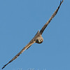 "Northern Harrier © 2009 Nova Mackentley Laguna Atascosa NWR, TX NHA  <div class=""ss-paypal-button""><div class=""ss-paypal-add-to-cart-section""><div class=""ss-paypal-product-options""><h4>Mat Sizes</h4><ul><li><a href=""https://www.paypal.com/cgi-bin/webscr?cmd=_cart&business=T77V5VKCW4K2U&lc=US&item_name=Northern%20Harrier%20%C2%A9%202009%20Nova%20Mackentley%20Laguna%20Atascosa%20NWR%2C%20TX%20NHA&item_number=http%3A%2F%2Fwww.nightflightimages.com%2FGalleries-1%2FHawks%2Fi-9vXsQr4&button_subtype=products&no_note=0&cn=Add%20special%20instructions%20to%20the%20seller%3A&no_shipping=2&currency_code=USD&weight_unit=lbs&add=1&bn=PP-ShopCartBF%3Abtn_cart_SM.gif%3ANonHosted&on0=Mat%20Sizes&option_select0=5%20x%207&option_amount0=10.00&option_select1=8%20x%2010&option_amount1=18.00&option_select2=11%20x%2014&option_amount2=28.00&option_select3=card&option_amount3=4.00&option_index=0&charset=utf-8&submit=&os0=5%20x%207"" target=""paypal""><span>5 x 7 $11.00 USD</span><img src=""https://www.paypalobjects.com/en_US/i/btn/btn_cart_SM.gif""></a></li><li><a href=""https://www.paypal.com/cgi-bin/webscr?cmd=_cart&business=T77V5VKCW4K2U&lc=US&item_name=Northern%20Harrier%20%C2%A9%202009%20Nova%20Mackentley%20Laguna%20Atascosa%20NWR%2C%20TX%20NHA&item_number=http%3A%2F%2Fwww.nightflightimages.com%2FGalleries-1%2FHawks%2Fi-9vXsQr4&button_subtype=products&no_note=0&cn=Add%20special%20instructions%20to%20the%20seller%3A&no_shipping=2&currency_code=USD&weight_unit=lbs&add=1&bn=PP-ShopCartBF%3Abtn_cart_SM.gif%3ANonHosted&on0=Mat%20Sizes&option_select0=5%20x%207&option_amount0=10.00&option_select1=8%20x%2010&option_amount1=18.00&option_select2=11%20x%2014&option_amount2=28.00&option_select3=card&option_amount3=4.00&option_index=0&charset=utf-8&submit=&os0=8%20x%2010"" target=""paypal""><span>8 x 10 $19.00 USD</span><img src=""https://www.paypalobjects.com/en_US/i/btn/btn_cart_SM.gif""></a></li><li><a href=""https://www.paypal.com/cgi-bin/webscr?cmd=_cart&business=T77V5VKCW4K2U&lc=US&item_name=Northern%20Harrier%20%C2%A9%202009%20Nova%20Mackentley%20Laguna%20Atascosa%20NWR%2C%20TX%20NHA&item_number=http%3A%2F%2Fwww.nightflightimages.com%2FGalleries-1%2FHawks%2Fi-9vXsQr4&button_subtype=products&no_note=0&cn=Add%20special%20instructions%20to%20the%20seller%3A&no_shipping=2&currency_code=USD&weight_unit=lbs&add=1&bn=PP-ShopCartBF%3Abtn_cart_SM.gif%3ANonHosted&on0=Mat%20Sizes&option_select0=5%20x%207&option_amount0=10.00&option_select1=8%20x%2010&option_amount1=18.00&option_select2=11%20x%2014&option_amount2=28.00&option_select3=card&option_amount3=4.00&option_index=0&charset=utf-8&submit=&os0=11%20x%2014"" target=""paypal""><span>11 x 14 $29.00 USD</span><img src=""https://www.paypalobjects.com/en_US/i/btn/btn_cart_SM.gif""></a></li><li><a href=""https://www.paypal.com/cgi-bin/webscr?cmd=_cart&business=T77V5VKCW4K2U&lc=US&item_name=Northern%20Harrier%20%C2%A9%202009%20Nova%20Mackentley%20Laguna%20Atascosa%20NWR%2C%20TX%20NHA&item_number=http%3A%2F%2Fwww.nightflightimages.com%2FGalleries-1%2FHawks%2Fi-9vXsQr4&button_subtype=products&no_note=0&cn=Add%20special%20instructions%20to%20the%20seller%3A&no_shipping=2&currency_code=USD&weight_unit=lbs&add=1&bn=PP-ShopCartBF%3Abtn_cart_SM.gif%3ANonHosted&on0=Mat%20Sizes&option_select0=5%20x%207&option_amount0=10.00&option_select1=8%20x%2010&option_amount1=18.00&option_select2=11%20x%2014&option_amount2=28.00&option_select3=card&option_amount3=4.00&option_index=0&charset=utf-8&submit=&os0=card"" target=""paypal""><span>card $5.00 USD</span><img src=""https://www.paypalobjects.com/en_US/i/btn/btn_cart_SM.gif""></a></li></ul></div></div> <div class=""ss-paypal-view-cart-section""><a href=""https://www.paypal.com/cgi-bin/webscr?cmd=_cart&business=T77V5VKCW4K2U&display=1&item_name=Northern%20Harrier%20%C2%A9%202009%20Nova%20Mackentley%20Laguna%20Atascosa%20NWR%2C%20TX%20NHA&item_number=http%3A%2F%2Fwww.nightflightimages.com%2FGalleries-1%2FHawks%2Fi-9vXsQr4&charset=utf-8&submit="" target=""paypal"" class=""ss-paypal-submit-button""><img src=""https://www.paypalobjects.com/en_US/i/btn/btn_viewcart_LG.gif""></a></div></div><div class=""ss-paypal-button-end""></div>"
