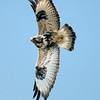 "Rough-legged Hawk © 2008 Chris M. Neri. Whitefish Point, MI RLHAWP  <div class=""ss-paypal-button""><div class=""ss-paypal-add-to-cart-section""><div class=""ss-paypal-product-options""><h4>Mat Sizes</h4><ul><li><a href=""https://www.paypal.com/cgi-bin/webscr?cmd=_cart&business=T77V5VKCW4K2U&lc=US&item_name=Rough-legged%20Hawk%20%C2%A9%202008%20Chris%20M.%20Neri.%20Whitefish%20Point%2C%20MI%20RLHAWP&item_number=http%3A%2F%2Fwww.nightflightimages.com%2FGalleries-1%2FHawks%2Fi-9xSnWKB&button_subtype=products&no_note=0&cn=Add%20special%20instructions%20to%20the%20seller%3A&no_shipping=2&currency_code=USD&weight_unit=lbs&add=1&bn=PP-ShopCartBF%3Abtn_cart_SM.gif%3ANonHosted&on0=Mat%20Sizes&option_select0=5%20x%207&option_amount0=10.00&option_select1=8%20x%2010&option_amount1=18.00&option_select2=11%20x%2014&option_amount2=28.00&option_select3=card&option_amount3=4.00&option_index=0&charset=utf-8&submit=&os0=5%20x%207"" target=""paypal""><span>5 x 7 $11.00 USD</span><img src=""https://www.paypalobjects.com/en_US/i/btn/btn_cart_SM.gif""></a></li><li><a href=""https://www.paypal.com/cgi-bin/webscr?cmd=_cart&business=T77V5VKCW4K2U&lc=US&item_name=Rough-legged%20Hawk%20%C2%A9%202008%20Chris%20M.%20Neri.%20Whitefish%20Point%2C%20MI%20RLHAWP&item_number=http%3A%2F%2Fwww.nightflightimages.com%2FGalleries-1%2FHawks%2Fi-9xSnWKB&button_subtype=products&no_note=0&cn=Add%20special%20instructions%20to%20the%20seller%3A&no_shipping=2&currency_code=USD&weight_unit=lbs&add=1&bn=PP-ShopCartBF%3Abtn_cart_SM.gif%3ANonHosted&on0=Mat%20Sizes&option_select0=5%20x%207&option_amount0=10.00&option_select1=8%20x%2010&option_amount1=18.00&option_select2=11%20x%2014&option_amount2=28.00&option_select3=card&option_amount3=4.00&option_index=0&charset=utf-8&submit=&os0=8%20x%2010"" target=""paypal""><span>8 x 10 $19.00 USD</span><img src=""https://www.paypalobjects.com/en_US/i/btn/btn_cart_SM.gif""></a></li><li><a href=""https://www.paypal.com/cgi-bin/webscr?cmd=_cart&business=T77V5VKCW4K2U&lc=US&item_name=Rough-legged%20Hawk%20%C2%A9%202008%20Chris%20M.%20Neri.%20Whitefish%20Point%2C%20MI%20RLHAWP&item_number=http%3A%2F%2Fwww.nightflightimages.com%2FGalleries-1%2FHawks%2Fi-9xSnWKB&button_subtype=products&no_note=0&cn=Add%20special%20instructions%20to%20the%20seller%3A&no_shipping=2&currency_code=USD&weight_unit=lbs&add=1&bn=PP-ShopCartBF%3Abtn_cart_SM.gif%3ANonHosted&on0=Mat%20Sizes&option_select0=5%20x%207&option_amount0=10.00&option_select1=8%20x%2010&option_amount1=18.00&option_select2=11%20x%2014&option_amount2=28.00&option_select3=card&option_amount3=4.00&option_index=0&charset=utf-8&submit=&os0=11%20x%2014"" target=""paypal""><span>11 x 14 $29.00 USD</span><img src=""https://www.paypalobjects.com/en_US/i/btn/btn_cart_SM.gif""></a></li><li><a href=""https://www.paypal.com/cgi-bin/webscr?cmd=_cart&business=T77V5VKCW4K2U&lc=US&item_name=Rough-legged%20Hawk%20%C2%A9%202008%20Chris%20M.%20Neri.%20Whitefish%20Point%2C%20MI%20RLHAWP&item_number=http%3A%2F%2Fwww.nightflightimages.com%2FGalleries-1%2FHawks%2Fi-9xSnWKB&button_subtype=products&no_note=0&cn=Add%20special%20instructions%20to%20the%20seller%3A&no_shipping=2&currency_code=USD&weight_unit=lbs&add=1&bn=PP-ShopCartBF%3Abtn_cart_SM.gif%3ANonHosted&on0=Mat%20Sizes&option_select0=5%20x%207&option_amount0=10.00&option_select1=8%20x%2010&option_amount1=18.00&option_select2=11%20x%2014&option_amount2=28.00&option_select3=card&option_amount3=4.00&option_index=0&charset=utf-8&submit=&os0=card"" target=""paypal""><span>card $5.00 USD</span><img src=""https://www.paypalobjects.com/en_US/i/btn/btn_cart_SM.gif""></a></li></ul></div></div> <div class=""ss-paypal-view-cart-section""><a href=""https://www.paypal.com/cgi-bin/webscr?cmd=_cart&business=T77V5VKCW4K2U&display=1&item_name=Rough-legged%20Hawk%20%C2%A9%202008%20Chris%20M.%20Neri.%20Whitefish%20Point%2C%20MI%20RLHAWP&item_number=http%3A%2F%2Fwww.nightflightimages.com%2FGalleries-1%2FHawks%2Fi-9xSnWKB&charset=utf-8&submit="" target=""paypal"" class=""ss-paypal-submit-button""><img src=""https://www.paypalobjects.com/en_US/i/btn/btn_viewcart_LG.gif""></a></div></div><div class=""ss-paypal-button-end""></div>"