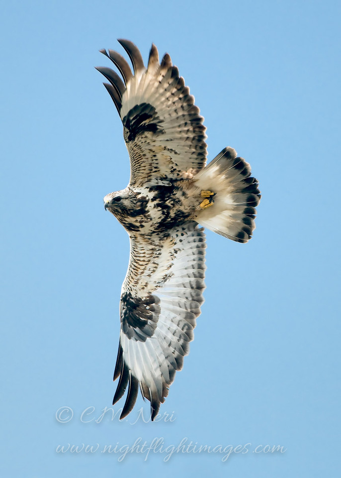 """Rough-legged Hawk © 2008 Chris M. Neri. Whitefish Point, MI RLHAWP  <div class=""""ss-paypal-button""""><div class=""""ss-paypal-add-to-cart-section""""><div class=""""ss-paypal-product-options""""><h4>Mat Sizes</h4><ul><li><a href=""""https://www.paypal.com/cgi-bin/webscr?cmd=_cart&business=T77V5VKCW4K2U&lc=US&item_name=Rough-legged%20Hawk%20%C2%A9%202008%20Chris%20M.%20Neri.%20Whitefish%20Point%2C%20MI%20RLHAWP&item_number=http%3A%2F%2Fwww.nightflightimages.com%2FGalleries-1%2FHawks%2Fi-9xSnWKB&button_subtype=products&no_note=0&cn=Add%20special%20instructions%20to%20the%20seller%3A&no_shipping=2&currency_code=USD&weight_unit=lbs&add=1&bn=PP-ShopCartBF%3Abtn_cart_SM.gif%3ANonHosted&on0=Mat%20Sizes&option_select0=5%20x%207&option_amount0=10.00&option_select1=8%20x%2010&option_amount1=18.00&option_select2=11%20x%2014&option_amount2=28.00&option_select3=card&option_amount3=4.00&option_index=0&charset=utf-8&submit=&os0=5%20x%207"""" target=""""paypal""""><span>5 x 7 $11.00 USD</span><img src=""""https://www.paypalobjects.com/en_US/i/btn/btn_cart_SM.gif""""></a></li><li><a href=""""https://www.paypal.com/cgi-bin/webscr?cmd=_cart&business=T77V5VKCW4K2U&lc=US&item_name=Rough-legged%20Hawk%20%C2%A9%202008%20Chris%20M.%20Neri.%20Whitefish%20Point%2C%20MI%20RLHAWP&item_number=http%3A%2F%2Fwww.nightflightimages.com%2FGalleries-1%2FHawks%2Fi-9xSnWKB&button_subtype=products&no_note=0&cn=Add%20special%20instructions%20to%20the%20seller%3A&no_shipping=2&currency_code=USD&weight_unit=lbs&add=1&bn=PP-ShopCartBF%3Abtn_cart_SM.gif%3ANonHosted&on0=Mat%20Sizes&option_select0=5%20x%207&option_amount0=10.00&option_select1=8%20x%2010&option_amount1=18.00&option_select2=11%20x%2014&option_amount2=28.00&option_select3=card&option_amount3=4.00&option_index=0&charset=utf-8&submit=&os0=8%20x%2010"""" target=""""paypal""""><span>8 x 10 $19.00 USD</span><img src=""""https://www.paypalobjects.com/en_US/i/btn/btn_cart_SM.gif""""></a></li><li><a href=""""https://www.paypal.com/cgi-bin/webscr?cmd=_cart&business=T77V5VKCW4K2U&lc=US&item_name=Rough-legged%2"""