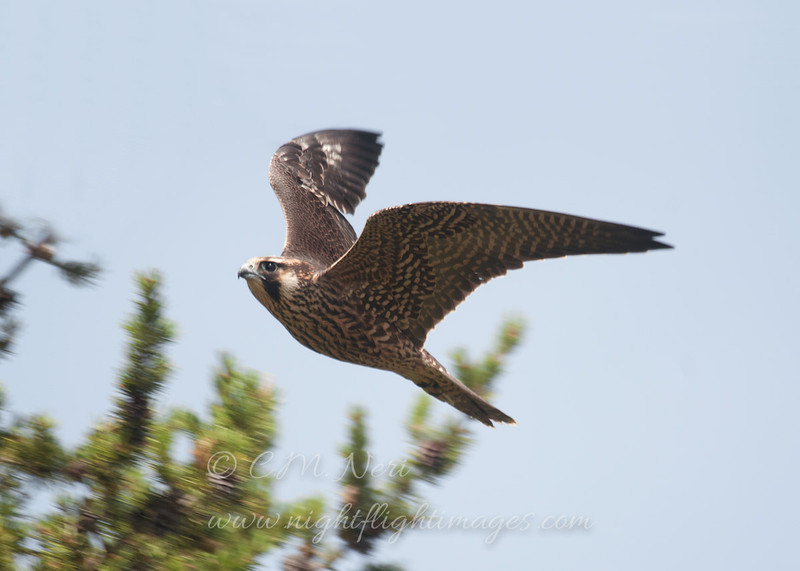 """Peregrine Falcon © 2013 C. M. Neri Whitefish Point, MI PEFAWP13  <div class=""""ss-paypal-button""""><div class=""""ss-paypal-add-to-cart-section""""><div class=""""ss-paypal-product-options""""><h4>Mat Sizes</h4><ul><li><a href=""""https://www.paypal.com/cgi-bin/webscr?cmd=_cart&business=T77V5VKCW4K2U&lc=US&item_name=Peregrine%20Falcon%20%C2%A9%202013%20C.%20M.%20Neri%20Whitefish%20Point%2C%20MI%20PEFAWP13&item_number=http%3A%2F%2Fwww.nightflightimages.com%2FGalleries-1%2FHawks%2Fi-C7mMvrb&button_subtype=products&no_note=0&cn=Add%20special%20instructions%20to%20the%20seller%3A&no_shipping=2&currency_code=USD&weight_unit=lbs&add=1&bn=PP-ShopCartBF%3Abtn_cart_SM.gif%3ANonHosted&on0=Mat%20Sizes&option_select0=5%20x%207&option_amount0=10.00&option_select1=8%20x%2010&option_amount1=18.00&option_select2=11%20x%2014&option_amount2=28.00&option_select3=card&option_amount3=4.00&option_index=0&charset=utf-8&submit=&os0=5%20x%207"""" target=""""paypal""""><span>5 x 7 $11.00 USD</span><img src=""""https://www.paypalobjects.com/en_US/i/btn/btn_cart_SM.gif""""></a></li><li><a href=""""https://www.paypal.com/cgi-bin/webscr?cmd=_cart&business=T77V5VKCW4K2U&lc=US&item_name=Peregrine%20Falcon%20%C2%A9%202013%20C.%20M.%20Neri%20Whitefish%20Point%2C%20MI%20PEFAWP13&item_number=http%3A%2F%2Fwww.nightflightimages.com%2FGalleries-1%2FHawks%2Fi-C7mMvrb&button_subtype=products&no_note=0&cn=Add%20special%20instructions%20to%20the%20seller%3A&no_shipping=2&currency_code=USD&weight_unit=lbs&add=1&bn=PP-ShopCartBF%3Abtn_cart_SM.gif%3ANonHosted&on0=Mat%20Sizes&option_select0=5%20x%207&option_amount0=10.00&option_select1=8%20x%2010&option_amount1=18.00&option_select2=11%20x%2014&option_amount2=28.00&option_select3=card&option_amount3=4.00&option_index=0&charset=utf-8&submit=&os0=8%20x%2010"""" target=""""paypal""""><span>8 x 10 $19.00 USD</span><img src=""""https://www.paypalobjects.com/en_US/i/btn/btn_cart_SM.gif""""></a></li><li><a href=""""https://www.paypal.com/cgi-bin/webscr?cmd=_cart&business=T77V5VKCW4K2U&lc=US&item_name=Peregrine%20Falcon%20%C"""