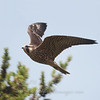"Peregrine Falcon © 2013 C. M. Neri Whitefish Point, MI PEFAWP13  <div class=""ss-paypal-button""><div class=""ss-paypal-add-to-cart-section""><div class=""ss-paypal-product-options""><h4>Mat Sizes</h4><ul><li><a href=""https://www.paypal.com/cgi-bin/webscr?cmd=_cart&business=T77V5VKCW4K2U&lc=US&item_name=Peregrine%20Falcon%20%C2%A9%202013%20C.%20M.%20Neri%20Whitefish%20Point%2C%20MI%20PEFAWP13&item_number=http%3A%2F%2Fwww.nightflightimages.com%2FGalleries-1%2FHawks%2Fi-C7mMvrb&button_subtype=products&no_note=0&cn=Add%20special%20instructions%20to%20the%20seller%3A&no_shipping=2&currency_code=USD&weight_unit=lbs&add=1&bn=PP-ShopCartBF%3Abtn_cart_SM.gif%3ANonHosted&on0=Mat%20Sizes&option_select0=5%20x%207&option_amount0=10.00&option_select1=8%20x%2010&option_amount1=18.00&option_select2=11%20x%2014&option_amount2=28.00&option_select3=card&option_amount3=4.00&option_index=0&charset=utf-8&submit=&os0=5%20x%207"" target=""paypal""><span>5 x 7 $11.00 USD</span><img src=""https://www.paypalobjects.com/en_US/i/btn/btn_cart_SM.gif""></a></li><li><a href=""https://www.paypal.com/cgi-bin/webscr?cmd=_cart&business=T77V5VKCW4K2U&lc=US&item_name=Peregrine%20Falcon%20%C2%A9%202013%20C.%20M.%20Neri%20Whitefish%20Point%2C%20MI%20PEFAWP13&item_number=http%3A%2F%2Fwww.nightflightimages.com%2FGalleries-1%2FHawks%2Fi-C7mMvrb&button_subtype=products&no_note=0&cn=Add%20special%20instructions%20to%20the%20seller%3A&no_shipping=2&currency_code=USD&weight_unit=lbs&add=1&bn=PP-ShopCartBF%3Abtn_cart_SM.gif%3ANonHosted&on0=Mat%20Sizes&option_select0=5%20x%207&option_amount0=10.00&option_select1=8%20x%2010&option_amount1=18.00&option_select2=11%20x%2014&option_amount2=28.00&option_select3=card&option_amount3=4.00&option_index=0&charset=utf-8&submit=&os0=8%20x%2010"" target=""paypal""><span>8 x 10 $19.00 USD</span><img src=""https://www.paypalobjects.com/en_US/i/btn/btn_cart_SM.gif""></a></li><li><a href=""https://www.paypal.com/cgi-bin/webscr?cmd=_cart&business=T77V5VKCW4K2U&lc=US&item_name=Peregrine%20Falcon%20%C2%A9%202013%20C.%20M.%20Neri%20Whitefish%20Point%2C%20MI%20PEFAWP13&item_number=http%3A%2F%2Fwww.nightflightimages.com%2FGalleries-1%2FHawks%2Fi-C7mMvrb&button_subtype=products&no_note=0&cn=Add%20special%20instructions%20to%20the%20seller%3A&no_shipping=2&currency_code=USD&weight_unit=lbs&add=1&bn=PP-ShopCartBF%3Abtn_cart_SM.gif%3ANonHosted&on0=Mat%20Sizes&option_select0=5%20x%207&option_amount0=10.00&option_select1=8%20x%2010&option_amount1=18.00&option_select2=11%20x%2014&option_amount2=28.00&option_select3=card&option_amount3=4.00&option_index=0&charset=utf-8&submit=&os0=11%20x%2014"" target=""paypal""><span>11 x 14 $29.00 USD</span><img src=""https://www.paypalobjects.com/en_US/i/btn/btn_cart_SM.gif""></a></li><li><a href=""https://www.paypal.com/cgi-bin/webscr?cmd=_cart&business=T77V5VKCW4K2U&lc=US&item_name=Peregrine%20Falcon%20%C2%A9%202013%20C.%20M.%20Neri%20Whitefish%20Point%2C%20MI%20PEFAWP13&item_number=http%3A%2F%2Fwww.nightflightimages.com%2FGalleries-1%2FHawks%2Fi-C7mMvrb&button_subtype=products&no_note=0&cn=Add%20special%20instructions%20to%20the%20seller%3A&no_shipping=2&currency_code=USD&weight_unit=lbs&add=1&bn=PP-ShopCartBF%3Abtn_cart_SM.gif%3ANonHosted&on0=Mat%20Sizes&option_select0=5%20x%207&option_amount0=10.00&option_select1=8%20x%2010&option_amount1=18.00&option_select2=11%20x%2014&option_amount2=28.00&option_select3=card&option_amount3=4.00&option_index=0&charset=utf-8&submit=&os0=card"" target=""paypal""><span>card $5.00 USD</span><img src=""https://www.paypalobjects.com/en_US/i/btn/btn_cart_SM.gif""></a></li></ul></div></div> <div class=""ss-paypal-view-cart-section""><a href=""https://www.paypal.com/cgi-bin/webscr?cmd=_cart&business=T77V5VKCW4K2U&display=1&item_name=Peregrine%20Falcon%20%C2%A9%202013%20C.%20M.%20Neri%20Whitefish%20Point%2C%20MI%20PEFAWP13&item_number=http%3A%2F%2Fwww.nightflightimages.com%2FGalleries-1%2FHawks%2Fi-C7mMvrb&charset=utf-8&submit="" target=""paypal"" class=""ss-paypal-submit-button""><img src=""https://www.paypalobjects.com/en_US/i/btn/btn_viewcart_LG.gif""></a></div></div><div class=""ss-paypal-button-end""></div>"