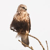 "Rough-legged Hawk © 2014 Nova Mackentley Duluth, MN RLT  <div class=""ss-paypal-button""><div class=""ss-paypal-add-to-cart-section""><div class=""ss-paypal-product-options""><h4>Mat Sizes</h4><ul><li><a href=""https://www.paypal.com/cgi-bin/webscr?cmd=_cart&business=T77V5VKCW4K2U&lc=US&item_name=Rough-legged%20Hawk%20%C2%A9%202014%20Nova%20Mackentley%20Duluth%2C%20MN%20RLT&item_number=http%3A%2F%2Fwww.nightflightimages.com%2FGalleries-1%2FHawks%2Fi-CHDfzSw&button_subtype=products&no_note=0&cn=Add%20special%20instructions%20to%20the%20seller%3A&no_shipping=2&currency_code=USD&weight_unit=lbs&add=1&bn=PP-ShopCartBF%3Abtn_cart_SM.gif%3ANonHosted&on0=Mat%20Sizes&option_select0=5%20x%207&option_amount0=10.00&option_select1=8%20x%2010&option_amount1=18.00&option_select2=11%20x%2014&option_amount2=28.00&option_select3=card&option_amount3=4.00&option_index=0&charset=utf-8&submit=&os0=5%20x%207"" target=""paypal""><span>5 x 7 $11.00 USD</span><img src=""https://www.paypalobjects.com/en_US/i/btn/btn_cart_SM.gif""></a></li><li><a href=""https://www.paypal.com/cgi-bin/webscr?cmd=_cart&business=T77V5VKCW4K2U&lc=US&item_name=Rough-legged%20Hawk%20%C2%A9%202014%20Nova%20Mackentley%20Duluth%2C%20MN%20RLT&item_number=http%3A%2F%2Fwww.nightflightimages.com%2FGalleries-1%2FHawks%2Fi-CHDfzSw&button_subtype=products&no_note=0&cn=Add%20special%20instructions%20to%20the%20seller%3A&no_shipping=2&currency_code=USD&weight_unit=lbs&add=1&bn=PP-ShopCartBF%3Abtn_cart_SM.gif%3ANonHosted&on0=Mat%20Sizes&option_select0=5%20x%207&option_amount0=10.00&option_select1=8%20x%2010&option_amount1=18.00&option_select2=11%20x%2014&option_amount2=28.00&option_select3=card&option_amount3=4.00&option_index=0&charset=utf-8&submit=&os0=8%20x%2010"" target=""paypal""><span>8 x 10 $19.00 USD</span><img src=""https://www.paypalobjects.com/en_US/i/btn/btn_cart_SM.gif""></a></li><li><a href=""https://www.paypal.com/cgi-bin/webscr?cmd=_cart&business=T77V5VKCW4K2U&lc=US&item_name=Rough-legged%20Hawk%20%C2%A9%202014%20Nova%20Mackentley%20Duluth%2C%20MN%20RLT&item_number=http%3A%2F%2Fwww.nightflightimages.com%2FGalleries-1%2FHawks%2Fi-CHDfzSw&button_subtype=products&no_note=0&cn=Add%20special%20instructions%20to%20the%20seller%3A&no_shipping=2&currency_code=USD&weight_unit=lbs&add=1&bn=PP-ShopCartBF%3Abtn_cart_SM.gif%3ANonHosted&on0=Mat%20Sizes&option_select0=5%20x%207&option_amount0=10.00&option_select1=8%20x%2010&option_amount1=18.00&option_select2=11%20x%2014&option_amount2=28.00&option_select3=card&option_amount3=4.00&option_index=0&charset=utf-8&submit=&os0=11%20x%2014"" target=""paypal""><span>11 x 14 $29.00 USD</span><img src=""https://www.paypalobjects.com/en_US/i/btn/btn_cart_SM.gif""></a></li><li><a href=""https://www.paypal.com/cgi-bin/webscr?cmd=_cart&business=T77V5VKCW4K2U&lc=US&item_name=Rough-legged%20Hawk%20%C2%A9%202014%20Nova%20Mackentley%20Duluth%2C%20MN%20RLT&item_number=http%3A%2F%2Fwww.nightflightimages.com%2FGalleries-1%2FHawks%2Fi-CHDfzSw&button_subtype=products&no_note=0&cn=Add%20special%20instructions%20to%20the%20seller%3A&no_shipping=2&currency_code=USD&weight_unit=lbs&add=1&bn=PP-ShopCartBF%3Abtn_cart_SM.gif%3ANonHosted&on0=Mat%20Sizes&option_select0=5%20x%207&option_amount0=10.00&option_select1=8%20x%2010&option_amount1=18.00&option_select2=11%20x%2014&option_amount2=28.00&option_select3=card&option_amount3=4.00&option_index=0&charset=utf-8&submit=&os0=card"" target=""paypal""><span>card $5.00 USD</span><img src=""https://www.paypalobjects.com/en_US/i/btn/btn_cart_SM.gif""></a></li></ul></div></div> <div class=""ss-paypal-view-cart-section""><a href=""https://www.paypal.com/cgi-bin/webscr?cmd=_cart&business=T77V5VKCW4K2U&display=1&item_name=Rough-legged%20Hawk%20%C2%A9%202014%20Nova%20Mackentley%20Duluth%2C%20MN%20RLT&item_number=http%3A%2F%2Fwww.nightflightimages.com%2FGalleries-1%2FHawks%2Fi-CHDfzSw&charset=utf-8&submit="" target=""paypal"" class=""ss-paypal-submit-button""><img src=""https://www.paypalobjects.com/en_US/i/btn/btn_viewcart_LG.gif""></a></div></div><div class=""ss-paypal-button-end""></div>"