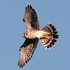 "American Kestrel © 2013 C. M. Neri.  Hawk Ridge, MN AMKEHR  <div class=""ss-paypal-button""><div class=""ss-paypal-add-to-cart-section""><div class=""ss-paypal-product-options""><h4>Mat Sizes</h4><ul><li><a href=""https://www.paypal.com/cgi-bin/webscr?cmd=_cart&business=T77V5VKCW4K2U&lc=US&item_name=American%20Kestrel%20%C2%A9%202013%20C.%20M.%20Neri.%20%20Hawk%20Ridge%2C%20MN%20AMKEHR&item_number=http%3A%2F%2Fwww.nightflightimages.com%2FGalleries-1%2FHawks%2Fi-D4tFHKW&button_subtype=products&no_note=0&cn=Add%20special%20instructions%20to%20the%20seller%3A&no_shipping=2&currency_code=USD&weight_unit=lbs&add=1&bn=PP-ShopCartBF%3Abtn_cart_SM.gif%3ANonHosted&on0=Mat%20Sizes&option_select0=5%20x%207&option_amount0=10.00&option_select1=8%20x%2010&option_amount1=18.00&option_select2=11%20x%2014&option_amount2=28.00&option_select3=card&option_amount3=4.00&option_index=0&charset=utf-8&submit=&os0=5%20x%207"" target=""paypal""><span>5 x 7 $11.00 USD</span><img src=""https://www.paypalobjects.com/en_US/i/btn/btn_cart_SM.gif""></a></li><li><a href=""https://www.paypal.com/cgi-bin/webscr?cmd=_cart&business=T77V5VKCW4K2U&lc=US&item_name=American%20Kestrel%20%C2%A9%202013%20C.%20M.%20Neri.%20%20Hawk%20Ridge%2C%20MN%20AMKEHR&item_number=http%3A%2F%2Fwww.nightflightimages.com%2FGalleries-1%2FHawks%2Fi-D4tFHKW&button_subtype=products&no_note=0&cn=Add%20special%20instructions%20to%20the%20seller%3A&no_shipping=2&currency_code=USD&weight_unit=lbs&add=1&bn=PP-ShopCartBF%3Abtn_cart_SM.gif%3ANonHosted&on0=Mat%20Sizes&option_select0=5%20x%207&option_amount0=10.00&option_select1=8%20x%2010&option_amount1=18.00&option_select2=11%20x%2014&option_amount2=28.00&option_select3=card&option_amount3=4.00&option_index=0&charset=utf-8&submit=&os0=8%20x%2010"" target=""paypal""><span>8 x 10 $19.00 USD</span><img src=""https://www.paypalobjects.com/en_US/i/btn/btn_cart_SM.gif""></a></li><li><a href=""https://www.paypal.com/cgi-bin/webscr?cmd=_cart&business=T77V5VKCW4K2U&lc=US&item_name=American%20Kestrel%20%C2%A9%202013%20C.%20M.%20Neri.%20%20Hawk%20Ridge%2C%20MN%20AMKEHR&item_number=http%3A%2F%2Fwww.nightflightimages.com%2FGalleries-1%2FHawks%2Fi-D4tFHKW&button_subtype=products&no_note=0&cn=Add%20special%20instructions%20to%20the%20seller%3A&no_shipping=2&currency_code=USD&weight_unit=lbs&add=1&bn=PP-ShopCartBF%3Abtn_cart_SM.gif%3ANonHosted&on0=Mat%20Sizes&option_select0=5%20x%207&option_amount0=10.00&option_select1=8%20x%2010&option_amount1=18.00&option_select2=11%20x%2014&option_amount2=28.00&option_select3=card&option_amount3=4.00&option_index=0&charset=utf-8&submit=&os0=11%20x%2014"" target=""paypal""><span>11 x 14 $29.00 USD</span><img src=""https://www.paypalobjects.com/en_US/i/btn/btn_cart_SM.gif""></a></li><li><a href=""https://www.paypal.com/cgi-bin/webscr?cmd=_cart&business=T77V5VKCW4K2U&lc=US&item_name=American%20Kestrel%20%C2%A9%202013%20C.%20M.%20Neri.%20%20Hawk%20Ridge%2C%20MN%20AMKEHR&item_number=http%3A%2F%2Fwww.nightflightimages.com%2FGalleries-1%2FHawks%2Fi-D4tFHKW&button_subtype=products&no_note=0&cn=Add%20special%20instructions%20to%20the%20seller%3A&no_shipping=2&currency_code=USD&weight_unit=lbs&add=1&bn=PP-ShopCartBF%3Abtn_cart_SM.gif%3ANonHosted&on0=Mat%20Sizes&option_select0=5%20x%207&option_amount0=10.00&option_select1=8%20x%2010&option_amount1=18.00&option_select2=11%20x%2014&option_amount2=28.00&option_select3=card&option_amount3=4.00&option_index=0&charset=utf-8&submit=&os0=card"" target=""paypal""><span>card $5.00 USD</span><img src=""https://www.paypalobjects.com/en_US/i/btn/btn_cart_SM.gif""></a></li></ul></div></div> <div class=""ss-paypal-view-cart-section""><a href=""https://www.paypal.com/cgi-bin/webscr?cmd=_cart&business=T77V5VKCW4K2U&display=1&item_name=American%20Kestrel%20%C2%A9%202013%20C.%20M.%20Neri.%20%20Hawk%20Ridge%2C%20MN%20AMKEHR&item_number=http%3A%2F%2Fwww.nightflightimages.com%2FGalleries-1%2FHawks%2Fi-D4tFHKW&charset=utf-8&submit="" target=""paypal"" class=""ss-paypal-submit-button""><img src=""https://www.paypalobjects.com/en_US/i/btn/btn_viewcart_LG.gif""></a></div></div><div class=""ss-paypal-button-end""></div>"