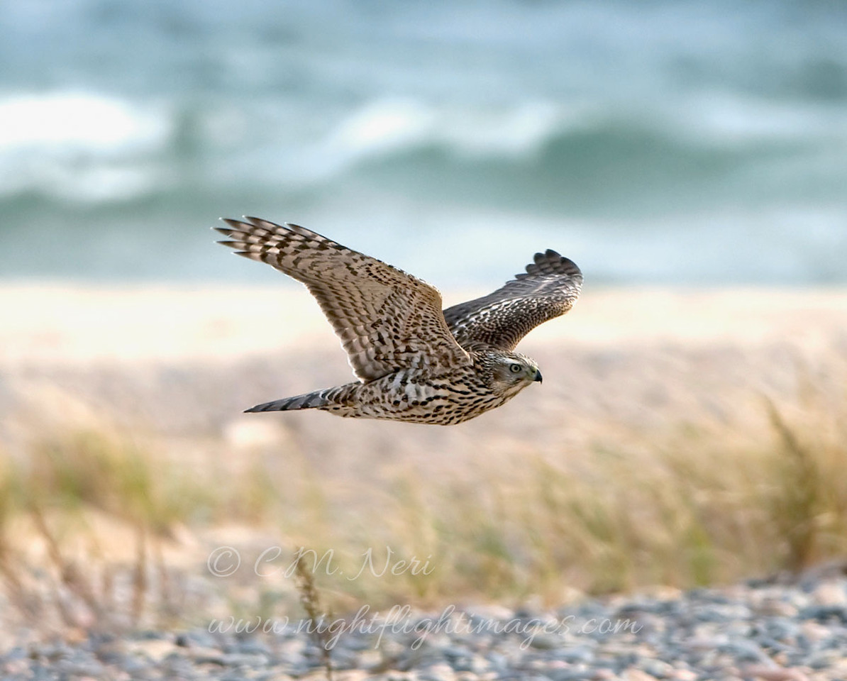 """Northern Goshawk © 2008 C. M. Neri. Whitefish Point, MI  <div class=""""ss-paypal-button""""><div class=""""ss-paypal-add-to-cart-section""""><div class=""""ss-paypal-product-options""""><h4>Mat Sizes</h4><ul><li><a href=""""https://www.paypal.com/cgi-bin/webscr?cmd=_cart&business=T77V5VKCW4K2U&lc=US&item_name=Northern%20Goshawk%20%C2%A9%202008%20C.%20M.%20Neri.%20Whitefish%20Point%2C%20MI&item_number=http%3A%2F%2Fwww.nightflightimages.com%2FGalleries-1%2FHawks%2Fi-FqTkGxv&button_subtype=products&no_note=0&cn=Add%20special%20instructions%20to%20the%20seller%3A&no_shipping=2&currency_code=USD&weight_unit=lbs&add=1&bn=PP-ShopCartBF%3Abtn_cart_SM.gif%3ANonHosted&on0=Mat%20Sizes&option_select0=5%20x%207&option_amount0=10.00&option_select1=8%20x%2010&option_amount1=18.00&option_select2=11%20x%2014&option_amount2=28.00&option_select3=card&option_amount3=4.00&option_index=0&charset=utf-8&submit=&os0=5%20x%207"""" target=""""paypal""""><span>5 x 7 $11.00 USD</span><img src=""""https://www.paypalobjects.com/en_US/i/btn/btn_cart_SM.gif""""></a></li><li><a href=""""https://www.paypal.com/cgi-bin/webscr?cmd=_cart&business=T77V5VKCW4K2U&lc=US&item_name=Northern%20Goshawk%20%C2%A9%202008%20C.%20M.%20Neri.%20Whitefish%20Point%2C%20MI&item_number=http%3A%2F%2Fwww.nightflightimages.com%2FGalleries-1%2FHawks%2Fi-FqTkGxv&button_subtype=products&no_note=0&cn=Add%20special%20instructions%20to%20the%20seller%3A&no_shipping=2&currency_code=USD&weight_unit=lbs&add=1&bn=PP-ShopCartBF%3Abtn_cart_SM.gif%3ANonHosted&on0=Mat%20Sizes&option_select0=5%20x%207&option_amount0=10.00&option_select1=8%20x%2010&option_amount1=18.00&option_select2=11%20x%2014&option_amount2=28.00&option_select3=card&option_amount3=4.00&option_index=0&charset=utf-8&submit=&os0=8%20x%2010"""" target=""""paypal""""><span>8 x 10 $19.00 USD</span><img src=""""https://www.paypalobjects.com/en_US/i/btn/btn_cart_SM.gif""""></a></li><li><a href=""""https://www.paypal.com/cgi-bin/webscr?cmd=_cart&business=T77V5VKCW4K2U&lc=US&item_name=Northern%20Goshawk%20%C2%A9%202008%20C.%20M.%20Neri"""