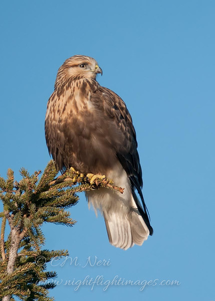 """Rough-legged Hawk © 2011 C. M. Neri Hawk Ridge, MN RLHAHRPRC  <div class=""""ss-paypal-button""""><div class=""""ss-paypal-add-to-cart-section""""><div class=""""ss-paypal-product-options""""><h4>Mat Sizes</h4><ul><li><a href=""""https://www.paypal.com/cgi-bin/webscr?cmd=_cart&amp;business=T77V5VKCW4K2U&amp;lc=US&amp;item_name=Rough-legged%20Hawk%20%C2%A9%202011%20C.%20M.%20Neri%20Hawk%20Ridge%2C%20MN%20RLHAHRPRC&amp;item_number=http%3A%2F%2Fwww.nightflightimages.com%2FGalleries-1%2FHawks%2Fi-JHv238H&amp;button_subtype=products&amp;no_note=0&amp;cn=Add%20special%20instructions%20to%20the%20seller%3A&amp;no_shipping=2&amp;currency_code=USD&amp;weight_unit=lbs&amp;add=1&amp;bn=PP-ShopCartBF%3Abtn_cart_SM.gif%3ANonHosted&amp;on0=Mat%20Sizes&amp;option_select0=5%20x%207&amp;option_amount0=10.00&amp;option_select1=8%20x%2010&amp;option_amount1=18.00&amp;option_select2=11%20x%2014&amp;option_amount2=28.00&amp;option_select3=card&amp;option_amount3=4.00&amp;option_index=0&amp;charset=utf-8&amp;submit=&amp;os0=5%20x%207"""" target=""""paypal""""><span>5 x 7 $11.00 USD</span><img src=""""https://www.paypalobjects.com/en_US/i/btn/btn_cart_SM.gif""""></a></li><li><a href=""""https://www.paypal.com/cgi-bin/webscr?cmd=_cart&amp;business=T77V5VKCW4K2U&amp;lc=US&amp;item_name=Rough-legged%20Hawk%20%C2%A9%202011%20C.%20M.%20Neri%20Hawk%20Ridge%2C%20MN%20RLHAHRPRC&amp;item_number=http%3A%2F%2Fwww.nightflightimages.com%2FGalleries-1%2FHawks%2Fi-JHv238H&amp;button_subtype=products&amp;no_note=0&amp;cn=Add%20special%20instructions%20to%20the%20seller%3A&amp;no_shipping=2&amp;currency_code=USD&amp;weight_unit=lbs&amp;add=1&amp;bn=PP-ShopCartBF%3Abtn_cart_SM.gif%3ANonHosted&amp;on0=Mat%20Sizes&amp;option_select0=5%20x%207&amp;option_amount0=10.00&amp;option_select1=8%20x%2010&amp;option_amount1=18.00&amp;option_select2=11%20x%2014&amp;option_amount2=28.00&amp;option_select3=card&amp;option_amount3=4.00&amp;option_index=0&amp;charset=utf-8&amp;submit=&amp;os0=8%20x%2010"""" target=""""paypal""""><span>8 x 10 $19.00 USD</span><img src="""""""