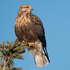 "Rough-legged Hawk © 2011 C. M. Neri Hawk Ridge, MN RLHAHRPRC  <div class=""ss-paypal-button""><div class=""ss-paypal-add-to-cart-section""><div class=""ss-paypal-product-options""><h4>Mat Sizes</h4><ul><li><a href=""https://www.paypal.com/cgi-bin/webscr?cmd=_cart&business=T77V5VKCW4K2U&lc=US&item_name=Rough-legged%20Hawk%20%C2%A9%202011%20C.%20M.%20Neri%20Hawk%20Ridge%2C%20MN%20RLHAHRPRC&item_number=http%3A%2F%2Fwww.nightflightimages.com%2FGalleries-1%2FHawks%2Fi-JHv238H&button_subtype=products&no_note=0&cn=Add%20special%20instructions%20to%20the%20seller%3A&no_shipping=2&currency_code=USD&weight_unit=lbs&add=1&bn=PP-ShopCartBF%3Abtn_cart_SM.gif%3ANonHosted&on0=Mat%20Sizes&option_select0=5%20x%207&option_amount0=10.00&option_select1=8%20x%2010&option_amount1=18.00&option_select2=11%20x%2014&option_amount2=28.00&option_select3=card&option_amount3=4.00&option_index=0&charset=utf-8&submit=&os0=5%20x%207"" target=""paypal""><span>5 x 7 $11.00 USD</span><img src=""https://www.paypalobjects.com/en_US/i/btn/btn_cart_SM.gif""></a></li><li><a href=""https://www.paypal.com/cgi-bin/webscr?cmd=_cart&business=T77V5VKCW4K2U&lc=US&item_name=Rough-legged%20Hawk%20%C2%A9%202011%20C.%20M.%20Neri%20Hawk%20Ridge%2C%20MN%20RLHAHRPRC&item_number=http%3A%2F%2Fwww.nightflightimages.com%2FGalleries-1%2FHawks%2Fi-JHv238H&button_subtype=products&no_note=0&cn=Add%20special%20instructions%20to%20the%20seller%3A&no_shipping=2&currency_code=USD&weight_unit=lbs&add=1&bn=PP-ShopCartBF%3Abtn_cart_SM.gif%3ANonHosted&on0=Mat%20Sizes&option_select0=5%20x%207&option_amount0=10.00&option_select1=8%20x%2010&option_amount1=18.00&option_select2=11%20x%2014&option_amount2=28.00&option_select3=card&option_amount3=4.00&option_index=0&charset=utf-8&submit=&os0=8%20x%2010"" target=""paypal""><span>8 x 10 $19.00 USD</span><img src=""https://www.paypalobjects.com/en_US/i/btn/btn_cart_SM.gif""></a></li><li><a href=""https://www.paypal.com/cgi-bin/webscr?cmd=_cart&business=T77V5VKCW4K2U&lc=US&item_name=Rough-legged%20Hawk%20%C2%A9%202011%20C.%20M.%20Neri%20Hawk%20Ridge%2C%20MN%20RLHAHRPRC&item_number=http%3A%2F%2Fwww.nightflightimages.com%2FGalleries-1%2FHawks%2Fi-JHv238H&button_subtype=products&no_note=0&cn=Add%20special%20instructions%20to%20the%20seller%3A&no_shipping=2&currency_code=USD&weight_unit=lbs&add=1&bn=PP-ShopCartBF%3Abtn_cart_SM.gif%3ANonHosted&on0=Mat%20Sizes&option_select0=5%20x%207&option_amount0=10.00&option_select1=8%20x%2010&option_amount1=18.00&option_select2=11%20x%2014&option_amount2=28.00&option_select3=card&option_amount3=4.00&option_index=0&charset=utf-8&submit=&os0=11%20x%2014"" target=""paypal""><span>11 x 14 $29.00 USD</span><img src=""https://www.paypalobjects.com/en_US/i/btn/btn_cart_SM.gif""></a></li><li><a href=""https://www.paypal.com/cgi-bin/webscr?cmd=_cart&business=T77V5VKCW4K2U&lc=US&item_name=Rough-legged%20Hawk%20%C2%A9%202011%20C.%20M.%20Neri%20Hawk%20Ridge%2C%20MN%20RLHAHRPRC&item_number=http%3A%2F%2Fwww.nightflightimages.com%2FGalleries-1%2FHawks%2Fi-JHv238H&button_subtype=products&no_note=0&cn=Add%20special%20instructions%20to%20the%20seller%3A&no_shipping=2&currency_code=USD&weight_unit=lbs&add=1&bn=PP-ShopCartBF%3Abtn_cart_SM.gif%3ANonHosted&on0=Mat%20Sizes&option_select0=5%20x%207&option_amount0=10.00&option_select1=8%20x%2010&option_amount1=18.00&option_select2=11%20x%2014&option_amount2=28.00&option_select3=card&option_amount3=4.00&option_index=0&charset=utf-8&submit=&os0=card"" target=""paypal""><span>card $5.00 USD</span><img src=""https://www.paypalobjects.com/en_US/i/btn/btn_cart_SM.gif""></a></li></ul></div></div> <div class=""ss-paypal-view-cart-section""><a href=""https://www.paypal.com/cgi-bin/webscr?cmd=_cart&business=T77V5VKCW4K2U&display=1&item_name=Rough-legged%20Hawk%20%C2%A9%202011%20C.%20M.%20Neri%20Hawk%20Ridge%2C%20MN%20RLHAHRPRC&item_number=http%3A%2F%2Fwww.nightflightimages.com%2FGalleries-1%2FHawks%2Fi-JHv238H&charset=utf-8&submit="" target=""paypal"" class=""ss-paypal-submit-button""><img src=""https://www.paypalobjects.com/en_US/i/btn/btn_viewcart_LG.gif""></a></div></div><div class=""ss-paypal-button-end""></div>"