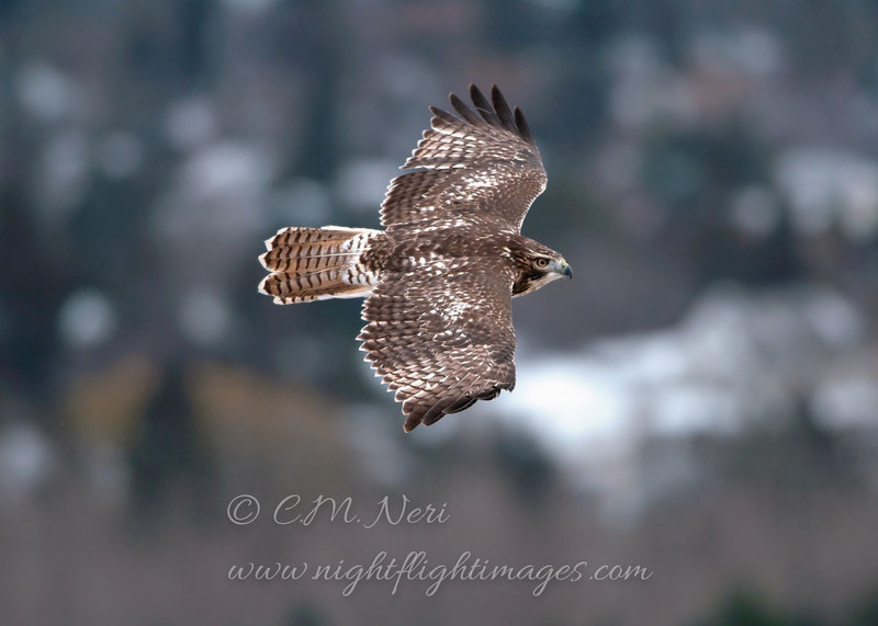 """Red-tailed Hawk © 2011 C. M. Neri Hawk Ridge, MN RTHA HR  <div class=""""ss-paypal-button""""><div class=""""ss-paypal-add-to-cart-section""""><div class=""""ss-paypal-product-options""""><h4>Mat Sizes</h4><ul><li><a href=""""https://www.paypal.com/cgi-bin/webscr?cmd=_cart&amp;business=T77V5VKCW4K2U&amp;lc=US&amp;item_name=Red-tailed%20Hawk%20%C2%A9%202011%20C.%20M.%20Neri%20Hawk%20Ridge%2C%20MN%20RTHA%20HR&amp;item_number=http%3A%2F%2Fwww.nightflightimages.com%2FGalleries-1%2FHawks%2Fi-M2ksmZZ&amp;button_subtype=products&amp;no_note=0&amp;cn=Add%20special%20instructions%20to%20the%20seller%3A&amp;no_shipping=2&amp;currency_code=USD&amp;weight_unit=lbs&amp;add=1&amp;bn=PP-ShopCartBF%3Abtn_cart_SM.gif%3ANonHosted&amp;on0=Mat%20Sizes&amp;option_select0=5%20x%207&amp;option_amount0=10.00&amp;option_select1=8%20x%2010&amp;option_amount1=18.00&amp;option_select2=11%20x%2014&amp;option_amount2=28.00&amp;option_select3=card&amp;option_amount3=4.00&amp;option_index=0&amp;charset=utf-8&amp;submit=&amp;os0=5%20x%207"""" target=""""paypal""""><span>5 x 7 $11.00 USD</span><img src=""""https://www.paypalobjects.com/en_US/i/btn/btn_cart_SM.gif""""></a></li><li><a href=""""https://www.paypal.com/cgi-bin/webscr?cmd=_cart&amp;business=T77V5VKCW4K2U&amp;lc=US&amp;item_name=Red-tailed%20Hawk%20%C2%A9%202011%20C.%20M.%20Neri%20Hawk%20Ridge%2C%20MN%20RTHA%20HR&amp;item_number=http%3A%2F%2Fwww.nightflightimages.com%2FGalleries-1%2FHawks%2Fi-M2ksmZZ&amp;button_subtype=products&amp;no_note=0&amp;cn=Add%20special%20instructions%20to%20the%20seller%3A&amp;no_shipping=2&amp;currency_code=USD&amp;weight_unit=lbs&amp;add=1&amp;bn=PP-ShopCartBF%3Abtn_cart_SM.gif%3ANonHosted&amp;on0=Mat%20Sizes&amp;option_select0=5%20x%207&amp;option_amount0=10.00&amp;option_select1=8%20x%2010&amp;option_amount1=18.00&amp;option_select2=11%20x%2014&amp;option_amount2=28.00&amp;option_select3=card&amp;option_amount3=4.00&amp;option_index=0&amp;charset=utf-8&amp;submit=&amp;os0=8%20x%2010"""" target=""""paypal""""><span>8 x 10 $19.00 USD</span><img src=""""https://"""