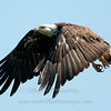 "Bald Eagle © 2012 Nova Mackentley Whitefish Point, MI BEL  <div class=""ss-paypal-button""><div class=""ss-paypal-add-to-cart-section""><div class=""ss-paypal-product-options""><h4>Mat Sizes</h4><ul><li><a href=""https://www.paypal.com/cgi-bin/webscr?cmd=_cart&business=T77V5VKCW4K2U&lc=US&item_name=Bald%20Eagle%20%C2%A9%202012%20Nova%20Mackentley%20Whitefish%20Point%2C%20MI%20BEL&item_number=http%3A%2F%2Fwww.nightflightimages.com%2FGalleries-1%2FHawks%2Fi-MKPgdgb&button_subtype=products&no_note=0&cn=Add%20special%20instructions%20to%20the%20seller%3A&no_shipping=2&currency_code=USD&weight_unit=lbs&add=1&bn=PP-ShopCartBF%3Abtn_cart_SM.gif%3ANonHosted&on0=Mat%20Sizes&option_select0=5%20x%207&option_amount0=10.00&option_select1=8%20x%2010&option_amount1=18.00&option_select2=11%20x%2014&option_amount2=28.00&option_select3=card&option_amount3=4.00&option_index=0&charset=utf-8&submit=&os0=5%20x%207"" target=""paypal""><span>5 x 7 $11.00 USD</span><img src=""https://www.paypalobjects.com/en_US/i/btn/btn_cart_SM.gif""></a></li><li><a href=""https://www.paypal.com/cgi-bin/webscr?cmd=_cart&business=T77V5VKCW4K2U&lc=US&item_name=Bald%20Eagle%20%C2%A9%202012%20Nova%20Mackentley%20Whitefish%20Point%2C%20MI%20BEL&item_number=http%3A%2F%2Fwww.nightflightimages.com%2FGalleries-1%2FHawks%2Fi-MKPgdgb&button_subtype=products&no_note=0&cn=Add%20special%20instructions%20to%20the%20seller%3A&no_shipping=2&currency_code=USD&weight_unit=lbs&add=1&bn=PP-ShopCartBF%3Abtn_cart_SM.gif%3ANonHosted&on0=Mat%20Sizes&option_select0=5%20x%207&option_amount0=10.00&option_select1=8%20x%2010&option_amount1=18.00&option_select2=11%20x%2014&option_amount2=28.00&option_select3=card&option_amount3=4.00&option_index=0&charset=utf-8&submit=&os0=8%20x%2010"" target=""paypal""><span>8 x 10 $19.00 USD</span><img src=""https://www.paypalobjects.com/en_US/i/btn/btn_cart_SM.gif""></a></li><li><a href=""https://www.paypal.com/cgi-bin/webscr?cmd=_cart&business=T77V5VKCW4K2U&lc=US&item_name=Bald%20Eagle%20%C2%A9%202012%20Nova%20Mackentley%20Whitefish%20Point%2C%20MI%20BEL&item_number=http%3A%2F%2Fwww.nightflightimages.com%2FGalleries-1%2FHawks%2Fi-MKPgdgb&button_subtype=products&no_note=0&cn=Add%20special%20instructions%20to%20the%20seller%3A&no_shipping=2&currency_code=USD&weight_unit=lbs&add=1&bn=PP-ShopCartBF%3Abtn_cart_SM.gif%3ANonHosted&on0=Mat%20Sizes&option_select0=5%20x%207&option_amount0=10.00&option_select1=8%20x%2010&option_amount1=18.00&option_select2=11%20x%2014&option_amount2=28.00&option_select3=card&option_amount3=4.00&option_index=0&charset=utf-8&submit=&os0=11%20x%2014"" target=""paypal""><span>11 x 14 $29.00 USD</span><img src=""https://www.paypalobjects.com/en_US/i/btn/btn_cart_SM.gif""></a></li><li><a href=""https://www.paypal.com/cgi-bin/webscr?cmd=_cart&business=T77V5VKCW4K2U&lc=US&item_name=Bald%20Eagle%20%C2%A9%202012%20Nova%20Mackentley%20Whitefish%20Point%2C%20MI%20BEL&item_number=http%3A%2F%2Fwww.nightflightimages.com%2FGalleries-1%2FHawks%2Fi-MKPgdgb&button_subtype=products&no_note=0&cn=Add%20special%20instructions%20to%20the%20seller%3A&no_shipping=2&currency_code=USD&weight_unit=lbs&add=1&bn=PP-ShopCartBF%3Abtn_cart_SM.gif%3ANonHosted&on0=Mat%20Sizes&option_select0=5%20x%207&option_amount0=10.00&option_select1=8%20x%2010&option_amount1=18.00&option_select2=11%20x%2014&option_amount2=28.00&option_select3=card&option_amount3=4.00&option_index=0&charset=utf-8&submit=&os0=card"" target=""paypal""><span>card $5.00 USD</span><img src=""https://www.paypalobjects.com/en_US/i/btn/btn_cart_SM.gif""></a></li></ul></div></div> <div class=""ss-paypal-view-cart-section""><a href=""https://www.paypal.com/cgi-bin/webscr?cmd=_cart&business=T77V5VKCW4K2U&display=1&item_name=Bald%20Eagle%20%C2%A9%202012%20Nova%20Mackentley%20Whitefish%20Point%2C%20MI%20BEL&item_number=http%3A%2F%2Fwww.nightflightimages.com%2FGalleries-1%2FHawks%2Fi-MKPgdgb&charset=utf-8&submit="" target=""paypal"" class=""ss-paypal-submit-button""><img src=""https://www.paypalobjects.com/en_US/i/btn/btn_viewcart_LG.gif""></a></div></div><div class=""ss-paypal-button-end""></div>"