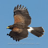 "Harris' Hawk © 2009 Nova Mackentley Laguna Atascosa NWR, TX HAH  <div class=""ss-paypal-button""><div class=""ss-paypal-add-to-cart-section""><div class=""ss-paypal-product-options""><h4>Mat Sizes</h4><ul><li><a href=""https://www.paypal.com/cgi-bin/webscr?cmd=_cart&business=T77V5VKCW4K2U&lc=US&item_name=Harris'%20Hawk%20%C2%A9%202009%20Nova%20Mackentley%20Laguna%20Atascosa%20NWR%2C%20TX%20HAH&item_number=http%3A%2F%2Fwww.nightflightimages.com%2FGalleries-1%2FHawks%2Fi-N8f39H4&button_subtype=products&no_note=0&cn=Add%20special%20instructions%20to%20the%20seller%3A&no_shipping=2&currency_code=USD&weight_unit=lbs&add=1&bn=PP-ShopCartBF%3Abtn_cart_SM.gif%3ANonHosted&on0=Mat%20Sizes&option_select0=5%20x%207&option_amount0=10.00&option_select1=8%20x%2010&option_amount1=18.00&option_select2=11%20x%2014&option_amount2=28.00&option_select3=card&option_amount3=4.00&option_index=0&charset=utf-8&submit=&os0=5%20x%207"" target=""paypal""><span>5 x 7 $11.00 USD</span><img src=""https://www.paypalobjects.com/en_US/i/btn/btn_cart_SM.gif""></a></li><li><a href=""https://www.paypal.com/cgi-bin/webscr?cmd=_cart&business=T77V5VKCW4K2U&lc=US&item_name=Harris'%20Hawk%20%C2%A9%202009%20Nova%20Mackentley%20Laguna%20Atascosa%20NWR%2C%20TX%20HAH&item_number=http%3A%2F%2Fwww.nightflightimages.com%2FGalleries-1%2FHawks%2Fi-N8f39H4&button_subtype=products&no_note=0&cn=Add%20special%20instructions%20to%20the%20seller%3A&no_shipping=2&currency_code=USD&weight_unit=lbs&add=1&bn=PP-ShopCartBF%3Abtn_cart_SM.gif%3ANonHosted&on0=Mat%20Sizes&option_select0=5%20x%207&option_amount0=10.00&option_select1=8%20x%2010&option_amount1=18.00&option_select2=11%20x%2014&option_amount2=28.00&option_select3=card&option_amount3=4.00&option_index=0&charset=utf-8&submit=&os0=8%20x%2010"" target=""paypal""><span>8 x 10 $19.00 USD</span><img src=""https://www.paypalobjects.com/en_US/i/btn/btn_cart_SM.gif""></a></li><li><a href=""https://www.paypal.com/cgi-bin/webscr?cmd=_cart&business=T77V5VKCW4K2U&lc=US&item_name=Harris'%20Hawk%20%C2%A9%202009%20Nova%20Mackentley%20Laguna%20Atascosa%20NWR%2C%20TX%20HAH&item_number=http%3A%2F%2Fwww.nightflightimages.com%2FGalleries-1%2FHawks%2Fi-N8f39H4&button_subtype=products&no_note=0&cn=Add%20special%20instructions%20to%20the%20seller%3A&no_shipping=2&currency_code=USD&weight_unit=lbs&add=1&bn=PP-ShopCartBF%3Abtn_cart_SM.gif%3ANonHosted&on0=Mat%20Sizes&option_select0=5%20x%207&option_amount0=10.00&option_select1=8%20x%2010&option_amount1=18.00&option_select2=11%20x%2014&option_amount2=28.00&option_select3=card&option_amount3=4.00&option_index=0&charset=utf-8&submit=&os0=11%20x%2014"" target=""paypal""><span>11 x 14 $29.00 USD</span><img src=""https://www.paypalobjects.com/en_US/i/btn/btn_cart_SM.gif""></a></li><li><a href=""https://www.paypal.com/cgi-bin/webscr?cmd=_cart&business=T77V5VKCW4K2U&lc=US&item_name=Harris'%20Hawk%20%C2%A9%202009%20Nova%20Mackentley%20Laguna%20Atascosa%20NWR%2C%20TX%20HAH&item_number=http%3A%2F%2Fwww.nightflightimages.com%2FGalleries-1%2FHawks%2Fi-N8f39H4&button_subtype=products&no_note=0&cn=Add%20special%20instructions%20to%20the%20seller%3A&no_shipping=2&currency_code=USD&weight_unit=lbs&add=1&bn=PP-ShopCartBF%3Abtn_cart_SM.gif%3ANonHosted&on0=Mat%20Sizes&option_select0=5%20x%207&option_amount0=10.00&option_select1=8%20x%2010&option_amount1=18.00&option_select2=11%20x%2014&option_amount2=28.00&option_select3=card&option_amount3=4.00&option_index=0&charset=utf-8&submit=&os0=card"" target=""paypal""><span>card $5.00 USD</span><img src=""https://www.paypalobjects.com/en_US/i/btn/btn_cart_SM.gif""></a></li></ul></div></div> <div class=""ss-paypal-view-cart-section""><a href=""https://www.paypal.com/cgi-bin/webscr?cmd=_cart&business=T77V5VKCW4K2U&display=1&item_name=Harris'%20Hawk%20%C2%A9%202009%20Nova%20Mackentley%20Laguna%20Atascosa%20NWR%2C%20TX%20HAH&item_number=http%3A%2F%2Fwww.nightflightimages.com%2FGalleries-1%2FHawks%2Fi-N8f39H4&charset=utf-8&submit="" target=""paypal"" class=""ss-paypal-submit-button""><img src=""https://www.paypalobjects.com/en_US/i/btn/btn_viewcart_LG.gif""></a></div></div><div class=""ss-paypal-button-end""></div>"