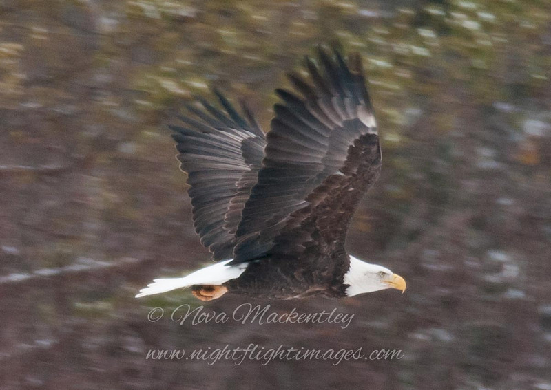 """Bald Eagle in flight © 2011 Nova Mackentley Duluth, MN BEF  <div class=""""ss-paypal-button""""><div class=""""ss-paypal-add-to-cart-section""""><div class=""""ss-paypal-product-options""""><h4>Mat Sizes</h4><ul><li><a href=""""https://www.paypal.com/cgi-bin/webscr?cmd=_cart&amp;business=T77V5VKCW4K2U&amp;lc=US&amp;item_name=Bald%20Eagle%20in%20flight%20%C2%A9%202011%20Nova%20Mackentley%20Duluth%2C%20MN%20BEF&amp;item_number=http%3A%2F%2Fwww.nightflightimages.com%2FGalleries-1%2FHawks%2Fi-Q7Kjt8k&amp;button_subtype=products&amp;no_note=0&amp;cn=Add%20special%20instructions%20to%20the%20seller%3A&amp;no_shipping=2&amp;currency_code=USD&amp;weight_unit=lbs&amp;add=1&amp;bn=PP-ShopCartBF%3Abtn_cart_SM.gif%3ANonHosted&amp;on0=Mat%20Sizes&amp;option_select0=5%20x%207&amp;option_amount0=10.00&amp;option_select1=8%20x%2010&amp;option_amount1=18.00&amp;option_select2=11%20x%2014&amp;option_amount2=28.00&amp;option_select3=card&amp;option_amount3=4.00&amp;option_index=0&amp;charset=utf-8&amp;submit=&amp;os0=5%20x%207"""" target=""""paypal""""><span>5 x 7 $11.00 USD</span><img src=""""https://www.paypalobjects.com/en_US/i/btn/btn_cart_SM.gif""""></a></li><li><a href=""""https://www.paypal.com/cgi-bin/webscr?cmd=_cart&amp;business=T77V5VKCW4K2U&amp;lc=US&amp;item_name=Bald%20Eagle%20in%20flight%20%C2%A9%202011%20Nova%20Mackentley%20Duluth%2C%20MN%20BEF&amp;item_number=http%3A%2F%2Fwww.nightflightimages.com%2FGalleries-1%2FHawks%2Fi-Q7Kjt8k&amp;button_subtype=products&amp;no_note=0&amp;cn=Add%20special%20instructions%20to%20the%20seller%3A&amp;no_shipping=2&amp;currency_code=USD&amp;weight_unit=lbs&amp;add=1&amp;bn=PP-ShopCartBF%3Abtn_cart_SM.gif%3ANonHosted&amp;on0=Mat%20Sizes&amp;option_select0=5%20x%207&amp;option_amount0=10.00&amp;option_select1=8%20x%2010&amp;option_amount1=18.00&amp;option_select2=11%20x%2014&amp;option_amount2=28.00&amp;option_select3=card&amp;option_amount3=4.00&amp;option_index=0&amp;charset=utf-8&amp;submit=&amp;os0=8%20x%2010"""" target=""""paypal""""><span>8 x 10 $19.00 USD</span><img src=""""https:"""