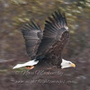 "Bald Eagle in flight © 2011 Nova Mackentley Duluth, MN BEF  <div class=""ss-paypal-button""><div class=""ss-paypal-add-to-cart-section""><div class=""ss-paypal-product-options""><h4>Mat Sizes</h4><ul><li><a href=""https://www.paypal.com/cgi-bin/webscr?cmd=_cart&business=T77V5VKCW4K2U&lc=US&item_name=Bald%20Eagle%20in%20flight%20%C2%A9%202011%20Nova%20Mackentley%20Duluth%2C%20MN%20BEF&item_number=http%3A%2F%2Fwww.nightflightimages.com%2FGalleries-1%2FHawks%2Fi-Q7Kjt8k&button_subtype=products&no_note=0&cn=Add%20special%20instructions%20to%20the%20seller%3A&no_shipping=2&currency_code=USD&weight_unit=lbs&add=1&bn=PP-ShopCartBF%3Abtn_cart_SM.gif%3ANonHosted&on0=Mat%20Sizes&option_select0=5%20x%207&option_amount0=10.00&option_select1=8%20x%2010&option_amount1=18.00&option_select2=11%20x%2014&option_amount2=28.00&option_select3=card&option_amount3=4.00&option_index=0&charset=utf-8&submit=&os0=5%20x%207"" target=""paypal""><span>5 x 7 $11.00 USD</span><img src=""https://www.paypalobjects.com/en_US/i/btn/btn_cart_SM.gif""></a></li><li><a href=""https://www.paypal.com/cgi-bin/webscr?cmd=_cart&business=T77V5VKCW4K2U&lc=US&item_name=Bald%20Eagle%20in%20flight%20%C2%A9%202011%20Nova%20Mackentley%20Duluth%2C%20MN%20BEF&item_number=http%3A%2F%2Fwww.nightflightimages.com%2FGalleries-1%2FHawks%2Fi-Q7Kjt8k&button_subtype=products&no_note=0&cn=Add%20special%20instructions%20to%20the%20seller%3A&no_shipping=2&currency_code=USD&weight_unit=lbs&add=1&bn=PP-ShopCartBF%3Abtn_cart_SM.gif%3ANonHosted&on0=Mat%20Sizes&option_select0=5%20x%207&option_amount0=10.00&option_select1=8%20x%2010&option_amount1=18.00&option_select2=11%20x%2014&option_amount2=28.00&option_select3=card&option_amount3=4.00&option_index=0&charset=utf-8&submit=&os0=8%20x%2010"" target=""paypal""><span>8 x 10 $19.00 USD</span><img src=""https://www.paypalobjects.com/en_US/i/btn/btn_cart_SM.gif""></a></li><li><a href=""https://www.paypal.com/cgi-bin/webscr?cmd=_cart&business=T77V5VKCW4K2U&lc=US&item_name=Bald%20Eagle%20in%20flight%20%C2%A9%202011%20Nova%20Mackentley%20Duluth%2C%20MN%20BEF&item_number=http%3A%2F%2Fwww.nightflightimages.com%2FGalleries-1%2FHawks%2Fi-Q7Kjt8k&button_subtype=products&no_note=0&cn=Add%20special%20instructions%20to%20the%20seller%3A&no_shipping=2&currency_code=USD&weight_unit=lbs&add=1&bn=PP-ShopCartBF%3Abtn_cart_SM.gif%3ANonHosted&on0=Mat%20Sizes&option_select0=5%20x%207&option_amount0=10.00&option_select1=8%20x%2010&option_amount1=18.00&option_select2=11%20x%2014&option_amount2=28.00&option_select3=card&option_amount3=4.00&option_index=0&charset=utf-8&submit=&os0=11%20x%2014"" target=""paypal""><span>11 x 14 $29.00 USD</span><img src=""https://www.paypalobjects.com/en_US/i/btn/btn_cart_SM.gif""></a></li><li><a href=""https://www.paypal.com/cgi-bin/webscr?cmd=_cart&business=T77V5VKCW4K2U&lc=US&item_name=Bald%20Eagle%20in%20flight%20%C2%A9%202011%20Nova%20Mackentley%20Duluth%2C%20MN%20BEF&item_number=http%3A%2F%2Fwww.nightflightimages.com%2FGalleries-1%2FHawks%2Fi-Q7Kjt8k&button_subtype=products&no_note=0&cn=Add%20special%20instructions%20to%20the%20seller%3A&no_shipping=2&currency_code=USD&weight_unit=lbs&add=1&bn=PP-ShopCartBF%3Abtn_cart_SM.gif%3ANonHosted&on0=Mat%20Sizes&option_select0=5%20x%207&option_amount0=10.00&option_select1=8%20x%2010&option_amount1=18.00&option_select2=11%20x%2014&option_amount2=28.00&option_select3=card&option_amount3=4.00&option_index=0&charset=utf-8&submit=&os0=card"" target=""paypal""><span>card $5.00 USD</span><img src=""https://www.paypalobjects.com/en_US/i/btn/btn_cart_SM.gif""></a></li></ul></div></div> <div class=""ss-paypal-view-cart-section""><a href=""https://www.paypal.com/cgi-bin/webscr?cmd=_cart&business=T77V5VKCW4K2U&display=1&item_name=Bald%20Eagle%20in%20flight%20%C2%A9%202011%20Nova%20Mackentley%20Duluth%2C%20MN%20BEF&item_number=http%3A%2F%2Fwww.nightflightimages.com%2FGalleries-1%2FHawks%2Fi-Q7Kjt8k&charset=utf-8&submit="" target=""paypal"" class=""ss-paypal-submit-button""><img src=""https://www.paypalobjects.com/en_US/i/btn/btn_viewcart_LG.gif""></a></div></div><div class=""ss-paypal-button-end""></div>"