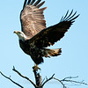 "Bald Eagle taking off © 2012 Nova Mackentley Whitefish Point, MI  BEE  <div class=""ss-paypal-button""><div class=""ss-paypal-add-to-cart-section""><div class=""ss-paypal-product-options""><h4>Mat Sizes</h4><ul><li><a href=""https://www.paypal.com/cgi-bin/webscr?cmd=_cart&amp;business=T77V5VKCW4K2U&amp;lc=US&amp;item_name=Bald%20Eagle%20taking%20off%20%C2%A9%202012%20Nova%20Mackentley%20Whitefish%20Point%2C%20MI%20%20BEE&amp;item_number=http%3A%2F%2Fwww.nightflightimages.com%2FGalleries-1%2FHawks%2Fi-QF3J47p&amp;button_subtype=products&amp;no_note=0&amp;cn=Add%20special%20instructions%20to%20the%20seller%3A&amp;no_shipping=2&amp;currency_code=USD&amp;weight_unit=lbs&amp;add=1&amp;bn=PP-ShopCartBF%3Abtn_cart_SM.gif%3ANonHosted&amp;on0=Mat%20Sizes&amp;option_select0=5%20x%207&amp;option_amount0=10.00&amp;option_select1=8%20x%2010&amp;option_amount1=18.00&amp;option_select2=11%20x%2014&amp;option_amount2=28.00&amp;option_select3=card&amp;option_amount3=4.00&amp;option_index=0&amp;charset=utf-8&amp;submit=&amp;os0=5%20x%207"" target=""paypal""><span>5 x 7 $11.00 USD</span><img src=""https://www.paypalobjects.com/en_US/i/btn/btn_cart_SM.gif""></a></li><li><a href=""https://www.paypal.com/cgi-bin/webscr?cmd=_cart&amp;business=T77V5VKCW4K2U&amp;lc=US&amp;item_name=Bald%20Eagle%20taking%20off%20%C2%A9%202012%20Nova%20Mackentley%20Whitefish%20Point%2C%20MI%20%20BEE&amp;item_number=http%3A%2F%2Fwww.nightflightimages.com%2FGalleries-1%2FHawks%2Fi-QF3J47p&amp;button_subtype=products&amp;no_note=0&amp;cn=Add%20special%20instructions%20to%20the%20seller%3A&amp;no_shipping=2&amp;currency_code=USD&amp;weight_unit=lbs&amp;add=1&amp;bn=PP-ShopCartBF%3Abtn_cart_SM.gif%3ANonHosted&amp;on0=Mat%20Sizes&amp;option_select0=5%20x%207&amp;option_amount0=10.00&amp;option_select1=8%20x%2010&amp;option_amount1=18.00&amp;option_select2=11%20x%2014&amp;option_amount2=28.00&amp;option_select3=card&amp;option_amount3=4.00&amp;option_index=0&amp;charset=utf-8&amp;submit=&amp;os0=8%20x%2010"" target=""paypal""><span>8 x 10 $19.00 USD</span><img src=""https://www.paypalobjects.com/en_US/i/btn/btn_cart_SM.gif""></a></li><li><a href=""https://www.paypal.com/cgi-bin/webscr?cmd=_cart&amp;business=T77V5VKCW4K2U&amp;lc=US&amp;item_name=Bald%20Eagle%20taking%20off%20%C2%A9%202012%20Nova%20Mackentley%20Whitefish%20Point%2C%20MI%20%20BEE&amp;item_number=http%3A%2F%2Fwww.nightflightimages.com%2FGalleries-1%2FHawks%2Fi-QF3J47p&amp;button_subtype=products&amp;no_note=0&amp;cn=Add%20special%20instructions%20to%20the%20seller%3A&amp;no_shipping=2&amp;currency_code=USD&amp;weight_unit=lbs&amp;add=1&amp;bn=PP-ShopCartBF%3Abtn_cart_SM.gif%3ANonHosted&amp;on0=Mat%20Sizes&amp;option_select0=5%20x%207&amp;option_amount0=10.00&amp;option_select1=8%20x%2010&amp;option_amount1=18.00&amp;option_select2=11%20x%2014&amp;option_amount2=28.00&amp;option_select3=card&amp;option_amount3=4.00&amp;option_index=0&amp;charset=utf-8&amp;submit=&amp;os0=11%20x%2014"" target=""paypal""><span>11 x 14 $29.00 USD</span><img src=""https://www.paypalobjects.com/en_US/i/btn/btn_cart_SM.gif""></a></li><li><a href=""https://www.paypal.com/cgi-bin/webscr?cmd=_cart&amp;business=T77V5VKCW4K2U&amp;lc=US&amp;item_name=Bald%20Eagle%20taking%20off%20%C2%A9%202012%20Nova%20Mackentley%20Whitefish%20Point%2C%20MI%20%20BEE&amp;item_number=http%3A%2F%2Fwww.nightflightimages.com%2FGalleries-1%2FHawks%2Fi-QF3J47p&amp;button_subtype=products&amp;no_note=0&amp;cn=Add%20special%20instructions%20to%20the%20seller%3A&amp;no_shipping=2&amp;currency_code=USD&amp;weight_unit=lbs&amp;add=1&amp;bn=PP-ShopCartBF%3Abtn_cart_SM.gif%3ANonHosted&amp;on0=Mat%20Sizes&amp;option_select0=5%20x%207&amp;option_amount0=10.00&amp;option_select1=8%20x%2010&amp;option_amount1=18.00&amp;option_select2=11%20x%2014&amp;option_amount2=28.00&amp;option_select3=card&amp;option_amount3=4.00&amp;option_index=0&amp;charset=utf-8&amp;submit=&amp;os0=card"" target=""paypal""><span>card $5.00 USD</span><img src=""https://www.paypalobjects.com/en_US/i/btn/btn_cart_SM.gif""></a></li></ul></div></div> <div class=""ss-paypal-view-cart-section""><a href=""https://www.paypal.com/cgi-bin/webscr?cmd=_cart&amp;business=T77V5VKCW4K2U&amp;display=1&amp;item_name=Bald%20Eagle%20taking%20off%20%C2%A9%202012%20Nova%20Mackentley%20Whitefish%20Point%2C%20MI%20%20BEE&amp;item_number=http%3A%2F%2Fwww.nightflightimages.com%2FGalleries-1%2FHawks%2Fi-QF3J47p&amp;charset=utf-8&amp;submit="" target=""paypal"" class=""ss-paypal-submit-button""><img src=""https://www.paypalobjects.com/en_US/i/btn/btn_viewcart_LG.gif""></a></div></div><div class=""ss-paypal-button-end""></div>"