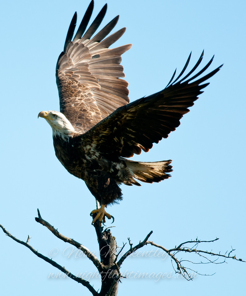 """Bald Eagle taking off © 2012 Nova Mackentley Whitefish Point, MI  BEE  <div class=""""ss-paypal-button""""><div class=""""ss-paypal-add-to-cart-section""""><div class=""""ss-paypal-product-options""""><h4>Mat Sizes</h4><ul><li><a href=""""https://www.paypal.com/cgi-bin/webscr?cmd=_cart&business=T77V5VKCW4K2U&lc=US&item_name=Bald%20Eagle%20taking%20off%20%C2%A9%202012%20Nova%20Mackentley%20Whitefish%20Point%2C%20MI%20%20BEE&item_number=http%3A%2F%2Fwww.nightflightimages.com%2FGalleries-1%2FHawks%2Fi-QF3J47p&button_subtype=products&no_note=0&cn=Add%20special%20instructions%20to%20the%20seller%3A&no_shipping=2&currency_code=USD&weight_unit=lbs&add=1&bn=PP-ShopCartBF%3Abtn_cart_SM.gif%3ANonHosted&on0=Mat%20Sizes&option_select0=5%20x%207&option_amount0=10.00&option_select1=8%20x%2010&option_amount1=18.00&option_select2=11%20x%2014&option_amount2=28.00&option_select3=card&option_amount3=4.00&option_index=0&charset=utf-8&submit=&os0=5%20x%207"""" target=""""paypal""""><span>5 x 7 $11.00 USD</span><img src=""""https://www.paypalobjects.com/en_US/i/btn/btn_cart_SM.gif""""></a></li><li><a href=""""https://www.paypal.com/cgi-bin/webscr?cmd=_cart&business=T77V5VKCW4K2U&lc=US&item_name=Bald%20Eagle%20taking%20off%20%C2%A9%202012%20Nova%20Mackentley%20Whitefish%20Point%2C%20MI%20%20BEE&item_number=http%3A%2F%2Fwww.nightflightimages.com%2FGalleries-1%2FHawks%2Fi-QF3J47p&button_subtype=products&no_note=0&cn=Add%20special%20instructions%20to%20the%20seller%3A&no_shipping=2&currency_code=USD&weight_unit=lbs&add=1&bn=PP-ShopCartBF%3Abtn_cart_SM.gif%3ANonHosted&on0=Mat%20Sizes&option_select0=5%20x%207&option_amount0=10.00&option_select1=8%20x%2010&option_amount1=18.00&option_select2=11%20x%2014&option_amount2=28.00&option_select3=card&option_amount3=4.00&option_index=0&charset=utf-8&submit=&os0=8%20x%2010"""" target=""""paypal""""><span>8 x 10 $19.00 USD</span><img src=""""https://www.paypalobjects.com/en_US/i/btn/btn_cart_SM.gif""""></a></li><li><a href=""""https://www.paypal.com/cgi-bin/webscr?cmd=_cart&business=T77V5VKCW4K2U&lc=US&item_na"""