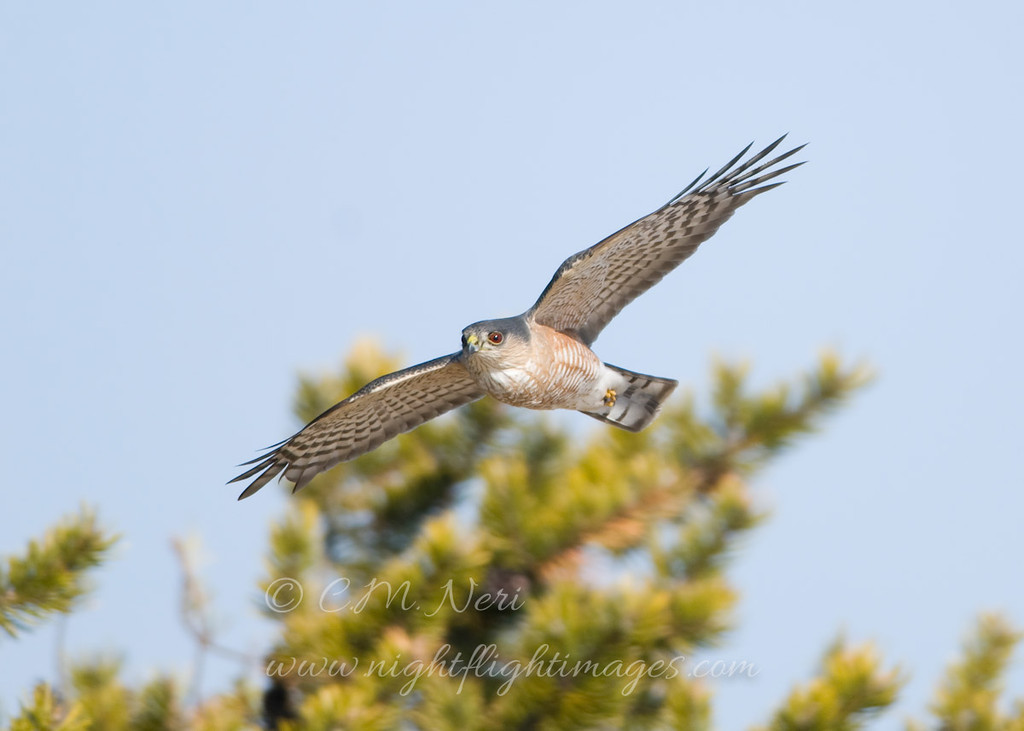 """Sharp-shinned Hawk  © 2011 C. M. Neri.  Whitefish Point, MI SSHAWP  <div class=""""ss-paypal-button""""><div class=""""ss-paypal-add-to-cart-section""""><div class=""""ss-paypal-product-options""""><h4>Mat Sizes</h4><ul><li><a href=""""https://www.paypal.com/cgi-bin/webscr?cmd=_cart&business=T77V5VKCW4K2U&lc=US&item_name=Sharp-shinned%20Hawk%20%20%C2%A9%202011%20C.%20M.%20Neri.%20%20Whitefish%20Point%2C%20MI%20SSHAWP&item_number=http%3A%2F%2Fwww.nightflightimages.com%2FGalleries-1%2FHawks%2Fi-QQRvJ3w&button_subtype=products&no_note=0&cn=Add%20special%20instructions%20to%20the%20seller%3A&no_shipping=2&currency_code=USD&weight_unit=lbs&add=1&bn=PP-ShopCartBF%3Abtn_cart_SM.gif%3ANonHosted&on0=Mat%20Sizes&option_select0=5%20x%207&option_amount0=10.00&option_select1=8%20x%2010&option_amount1=18.00&option_select2=11%20x%2014&option_amount2=28.00&option_select3=card&option_amount3=4.00&option_index=0&charset=utf-8&submit=&os0=5%20x%207"""" target=""""paypal""""><span>5 x 7 $11.00 USD</span><img src=""""https://www.paypalobjects.com/en_US/i/btn/btn_cart_SM.gif""""></a></li><li><a href=""""https://www.paypal.com/cgi-bin/webscr?cmd=_cart&business=T77V5VKCW4K2U&lc=US&item_name=Sharp-shinned%20Hawk%20%20%C2%A9%202011%20C.%20M.%20Neri.%20%20Whitefish%20Point%2C%20MI%20SSHAWP&item_number=http%3A%2F%2Fwww.nightflightimages.com%2FGalleries-1%2FHawks%2Fi-QQRvJ3w&button_subtype=products&no_note=0&cn=Add%20special%20instructions%20to%20the%20seller%3A&no_shipping=2&currency_code=USD&weight_unit=lbs&add=1&bn=PP-ShopCartBF%3Abtn_cart_SM.gif%3ANonHosted&on0=Mat%20Sizes&option_select0=5%20x%207&option_amount0=10.00&option_select1=8%20x%2010&option_amount1=18.00&option_select2=11%20x%2014&option_amount2=28.00&option_select3=card&option_amount3=4.00&option_index=0&charset=utf-8&submit=&os0=8%20x%2010"""" target=""""paypal""""><span>8 x 10 $19.00 USD</span><img src=""""https://www.paypalobjects.com/en_US/i/btn/btn_cart_SM.gif""""></a></li><li><a href=""""https://www.paypal.com/cgi-bin/webscr?cmd=_cart&business=T77V5VKCW4K2U&lc=US&item_name=Sharp-"""