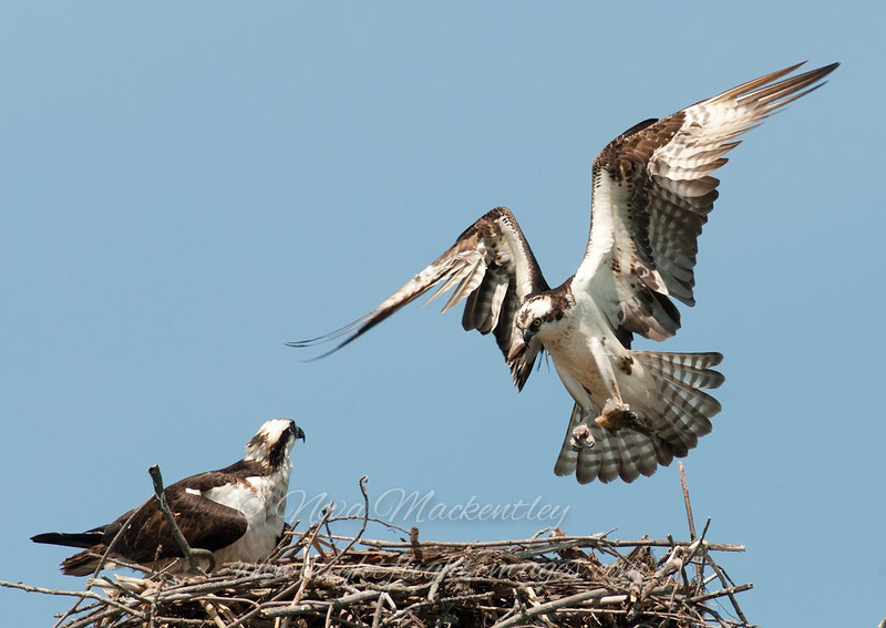 "Osprey Nest © 2010 Nova Mackentley Adirondack SP, NY OSN  <div class=""ss-paypal-button""><div class=""ss-paypal-add-to-cart-section""><div class=""ss-paypal-product-options""><h4>Mat Sizes</h4><ul><li><a href=""https://www.paypal.com/cgi-bin/webscr?cmd=_cart&amp;business=T77V5VKCW4K2U&amp;lc=US&amp;item_name=Osprey%20Nest%20%C2%A9%202010%20Nova%20Mackentley%20Adirondack%20SP%2C%20NY%20OSN&amp;item_number=http%3A%2F%2Fwww.nightflightimages.com%2FGalleries-1%2FHawks%2Fi-RLZLJw6&amp;button_subtype=products&amp;no_note=0&amp;cn=Add%20special%20instructions%20to%20the%20seller%3A&amp;no_shipping=2&amp;currency_code=USD&amp;weight_unit=lbs&amp;add=1&amp;bn=PP-ShopCartBF%3Abtn_cart_SM.gif%3ANonHosted&amp;on0=Mat%20Sizes&amp;option_select0=5%20x%207&amp;option_amount0=10.00&amp;option_select1=8%20x%2010&amp;option_amount1=18.00&amp;option_select2=11%20x%2014&amp;option_amount2=28.00&amp;option_select3=card&amp;option_amount3=4.00&amp;option_index=0&amp;charset=utf-8&amp;submit=&amp;os0=5%20x%207"" target=""paypal""><span>5 x 7 $11.00 USD</span><img src=""https://www.paypalobjects.com/en_US/i/btn/btn_cart_SM.gif""></a></li><li><a href=""https://www.paypal.com/cgi-bin/webscr?cmd=_cart&amp;business=T77V5VKCW4K2U&amp;lc=US&amp;item_name=Osprey%20Nest%20%C2%A9%202010%20Nova%20Mackentley%20Adirondack%20SP%2C%20NY%20OSN&amp;item_number=http%3A%2F%2Fwww.nightflightimages.com%2FGalleries-1%2FHawks%2Fi-RLZLJw6&amp;button_subtype=products&amp;no_note=0&amp;cn=Add%20special%20instructions%20to%20the%20seller%3A&amp;no_shipping=2&amp;currency_code=USD&amp;weight_unit=lbs&amp;add=1&amp;bn=PP-ShopCartBF%3Abtn_cart_SM.gif%3ANonHosted&amp;on0=Mat%20Sizes&amp;option_select0=5%20x%207&amp;option_amount0=10.00&amp;option_select1=8%20x%2010&amp;option_amount1=18.00&amp;option_select2=11%20x%2014&amp;option_amount2=28.00&amp;option_select3=card&amp;option_amount3=4.00&amp;option_index=0&amp;charset=utf-8&amp;submit=&amp;os0=8%20x%2010"" target=""paypal""><span>8 x 10 $19.00 USD</span><img src=""https://www.paypalobjects.com/en_US/i/btn/btn_cart_SM.gif""></a></li><li><a href=""https://www.paypal.com/cgi-bin/webscr?cmd=_cart&amp;business=T77V5VKCW4K2U&amp;lc=US&amp;item_name=Osprey%20Nest%20%C2%A9%202010%20Nova%20Mackentley%20Adirondack%20SP%2C%20NY%20OSN&amp;item_number=http%3A%2F%2Fwww.nightflightimages.com%2FGalleries-1%2FHawks%2Fi-RLZLJw6&amp;button_subtype=products&amp;no_note=0&amp;cn=Add%20special%20instructions%20to%20the%20seller%3A&amp;no_shipping=2&amp;currency_code=USD&amp;weight_unit=lbs&amp;add=1&amp;bn=PP-ShopCartBF%3Abtn_cart_SM.gif%3ANonHosted&amp;on0=Mat%20Sizes&amp;option_select0=5%20x%207&amp;option_amount0=10.00&amp;option_select1=8%20x%2010&amp;option_amount1=18.00&amp;option_select2=11%20x%2014&amp;option_amount2=28.00&amp;option_select3=card&amp;option_amount3=4.00&amp;option_index=0&amp;charset=utf-8&amp;submit=&amp;os0=11%20x%2014"" target=""paypal""><span>11 x 14 $29.00 USD</span><img src=""https://www.paypalobjects.com/en_US/i/btn/btn_cart_SM.gif""></a></li><li><a href=""https://www.paypal.com/cgi-bin/webscr?cmd=_cart&amp;business=T77V5VKCW4K2U&amp;lc=US&amp;item_name=Osprey%20Nest%20%C2%A9%202010%20Nova%20Mackentley%20Adirondack%20SP%2C%20NY%20OSN&amp;item_number=http%3A%2F%2Fwww.nightflightimages.com%2FGalleries-1%2FHawks%2Fi-RLZLJw6&amp;button_subtype=products&amp;no_note=0&amp;cn=Add%20special%20instructions%20to%20the%20seller%3A&amp;no_shipping=2&amp;currency_code=USD&amp;weight_unit=lbs&amp;add=1&amp;bn=PP-ShopCartBF%3Abtn_cart_SM.gif%3ANonHosted&amp;on0=Mat%20Sizes&amp;option_select0=5%20x%207&amp;option_amount0=10.00&amp;option_select1=8%20x%2010&amp;option_amount1=18.00&amp;option_select2=11%20x%2014&amp;option_amount2=28.00&amp;option_select3=card&amp;option_amount3=4.00&amp;option_index=0&amp;charset=utf-8&amp;submit=&amp;os0=card"" target=""paypal""><span>card $5.00 USD</span><img src=""https://www.paypalobjects.com/en_US/i/btn/btn_cart_SM.gif""></a></li></ul></div></div> <div class=""ss-paypal-view-cart-section""><a href=""https://www.paypal.com/cgi-bin/webscr?cmd=_cart&amp;business=T77V5VKCW4K2U&amp;display=1&amp;item_name=Osprey%20Nest%20%C2%A9%202010%20Nova%20Mackentley%20Adirondack%20SP%2C%20NY%20OSN&amp;item_number=http%3A%2F%2Fwww.nightflightimages.com%2FGalleries-1%2FHawks%2Fi-RLZLJw6&amp;charset=utf-8&amp;submit="" target=""paypal"" class=""ss-paypal-submit-button""><img src=""https://www.paypalobjects.com/en_US/i/btn/btn_viewcart_LG.gif""></a></div></div><div class=""ss-paypal-button-end""></div>"