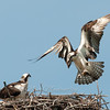 "Osprey Nest © 2010 Nova Mackentley Adirondack SP, NY OSN  <div class=""ss-paypal-button""><div class=""ss-paypal-add-to-cart-section""><div class=""ss-paypal-product-options""><h4>Mat Sizes</h4><ul><li><a href=""https://www.paypal.com/cgi-bin/webscr?cmd=_cart&business=T77V5VKCW4K2U&lc=US&item_name=Osprey%20Nest%20%C2%A9%202010%20Nova%20Mackentley%20Adirondack%20SP%2C%20NY%20OSN&item_number=http%3A%2F%2Fwww.nightflightimages.com%2FGalleries-1%2FHawks%2Fi-RLZLJw6&button_subtype=products&no_note=0&cn=Add%20special%20instructions%20to%20the%20seller%3A&no_shipping=2&currency_code=USD&weight_unit=lbs&add=1&bn=PP-ShopCartBF%3Abtn_cart_SM.gif%3ANonHosted&on0=Mat%20Sizes&option_select0=5%20x%207&option_amount0=10.00&option_select1=8%20x%2010&option_amount1=18.00&option_select2=11%20x%2014&option_amount2=28.00&option_select3=card&option_amount3=4.00&option_index=0&charset=utf-8&submit=&os0=5%20x%207"" target=""paypal""><span>5 x 7 $11.00 USD</span><img src=""https://www.paypalobjects.com/en_US/i/btn/btn_cart_SM.gif""></a></li><li><a href=""https://www.paypal.com/cgi-bin/webscr?cmd=_cart&business=T77V5VKCW4K2U&lc=US&item_name=Osprey%20Nest%20%C2%A9%202010%20Nova%20Mackentley%20Adirondack%20SP%2C%20NY%20OSN&item_number=http%3A%2F%2Fwww.nightflightimages.com%2FGalleries-1%2FHawks%2Fi-RLZLJw6&button_subtype=products&no_note=0&cn=Add%20special%20instructions%20to%20the%20seller%3A&no_shipping=2&currency_code=USD&weight_unit=lbs&add=1&bn=PP-ShopCartBF%3Abtn_cart_SM.gif%3ANonHosted&on0=Mat%20Sizes&option_select0=5%20x%207&option_amount0=10.00&option_select1=8%20x%2010&option_amount1=18.00&option_select2=11%20x%2014&option_amount2=28.00&option_select3=card&option_amount3=4.00&option_index=0&charset=utf-8&submit=&os0=8%20x%2010"" target=""paypal""><span>8 x 10 $19.00 USD</span><img src=""https://www.paypalobjects.com/en_US/i/btn/btn_cart_SM.gif""></a></li><li><a href=""https://www.paypal.com/cgi-bin/webscr?cmd=_cart&business=T77V5VKCW4K2U&lc=US&item_name=Osprey%20Nest%20%C2%A9%202010%20Nova%20Mackentley%20Adirondack%20SP%2C%20NY%20OSN&item_number=http%3A%2F%2Fwww.nightflightimages.com%2FGalleries-1%2FHawks%2Fi-RLZLJw6&button_subtype=products&no_note=0&cn=Add%20special%20instructions%20to%20the%20seller%3A&no_shipping=2&currency_code=USD&weight_unit=lbs&add=1&bn=PP-ShopCartBF%3Abtn_cart_SM.gif%3ANonHosted&on0=Mat%20Sizes&option_select0=5%20x%207&option_amount0=10.00&option_select1=8%20x%2010&option_amount1=18.00&option_select2=11%20x%2014&option_amount2=28.00&option_select3=card&option_amount3=4.00&option_index=0&charset=utf-8&submit=&os0=11%20x%2014"" target=""paypal""><span>11 x 14 $29.00 USD</span><img src=""https://www.paypalobjects.com/en_US/i/btn/btn_cart_SM.gif""></a></li><li><a href=""https://www.paypal.com/cgi-bin/webscr?cmd=_cart&business=T77V5VKCW4K2U&lc=US&item_name=Osprey%20Nest%20%C2%A9%202010%20Nova%20Mackentley%20Adirondack%20SP%2C%20NY%20OSN&item_number=http%3A%2F%2Fwww.nightflightimages.com%2FGalleries-1%2FHawks%2Fi-RLZLJw6&button_subtype=products&no_note=0&cn=Add%20special%20instructions%20to%20the%20seller%3A&no_shipping=2&currency_code=USD&weight_unit=lbs&add=1&bn=PP-ShopCartBF%3Abtn_cart_SM.gif%3ANonHosted&on0=Mat%20Sizes&option_select0=5%20x%207&option_amount0=10.00&option_select1=8%20x%2010&option_amount1=18.00&option_select2=11%20x%2014&option_amount2=28.00&option_select3=card&option_amount3=4.00&option_index=0&charset=utf-8&submit=&os0=card"" target=""paypal""><span>card $5.00 USD</span><img src=""https://www.paypalobjects.com/en_US/i/btn/btn_cart_SM.gif""></a></li></ul></div></div> <div class=""ss-paypal-view-cart-section""><a href=""https://www.paypal.com/cgi-bin/webscr?cmd=_cart&business=T77V5VKCW4K2U&display=1&item_name=Osprey%20Nest%20%C2%A9%202010%20Nova%20Mackentley%20Adirondack%20SP%2C%20NY%20OSN&item_number=http%3A%2F%2Fwww.nightflightimages.com%2FGalleries-1%2FHawks%2Fi-RLZLJw6&charset=utf-8&submit="" target=""paypal"" class=""ss-paypal-submit-button""><img src=""https://www.paypalobjects.com/en_US/i/btn/btn_viewcart_LG.gif""></a></div></div><div class=""ss-paypal-button-end""></div>"