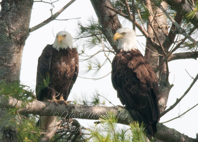 "Bald Eagles © 2015 Nova Mackentley Arcadia NP, ME  BEW  <div class=""ss-paypal-button""><div class=""ss-paypal-add-to-cart-section""><div class=""ss-paypal-product-options""><h4>Mat Sizes</h4><ul><li><a href=""https://www.paypal.com/cgi-bin/webscr?cmd=_cart&business=T77V5VKCW4K2U&lc=US&item_name=Bald%20Eagles%20%C2%A9%202015%20Nova%20Mackentley%20Arcadia%20NP%2C%20ME%20%20BEW&item_number=http%3A%2F%2Fwww.nightflightimages.com%2FGalleries-1%2FHawks%2Fi-Skd6LLp&button_subtype=products&no_note=0&cn=Add%20special%20instructions%20to%20the%20seller%3A&no_shipping=2&currency_code=USD&weight_unit=lbs&add=1&bn=PP-ShopCartBF%3Abtn_cart_SM.gif%3ANonHosted&on0=Mat%20Sizes&option_select0=5%20x%207&option_amount0=10.00&option_select1=8%20x%2010&option_amount1=18.00&option_select2=11%20x%2014&option_amount2=28.00&option_select3=card&option_amount3=4.00&option_index=0&charset=utf-8&submit=&os0=5%20x%207"" target=""paypal""><span>5 x 7 $11.00 USD</span><img src=""https://www.paypalobjects.com/en_US/i/btn/btn_cart_SM.gif""></a></li><li><a href=""https://www.paypal.com/cgi-bin/webscr?cmd=_cart&business=T77V5VKCW4K2U&lc=US&item_name=Bald%20Eagles%20%C2%A9%202015%20Nova%20Mackentley%20Arcadia%20NP%2C%20ME%20%20BEW&item_number=http%3A%2F%2Fwww.nightflightimages.com%2FGalleries-1%2FHawks%2Fi-Skd6LLp&button_subtype=products&no_note=0&cn=Add%20special%20instructions%20to%20the%20seller%3A&no_shipping=2&currency_code=USD&weight_unit=lbs&add=1&bn=PP-ShopCartBF%3Abtn_cart_SM.gif%3ANonHosted&on0=Mat%20Sizes&option_select0=5%20x%207&option_amount0=10.00&option_select1=8%20x%2010&option_amount1=18.00&option_select2=11%20x%2014&option_amount2=28.00&option_select3=card&option_amount3=4.00&option_index=0&charset=utf-8&submit=&os0=8%20x%2010"" target=""paypal""><span>8 x 10 $19.00 USD</span><img src=""https://www.paypalobjects.com/en_US/i/btn/btn_cart_SM.gif""></a></li><li><a href=""https://www.paypal.com/cgi-bin/webscr?cmd=_cart&business=T77V5VKCW4K2U&lc=US&item_name=Bald%20Eagles%20%C2%A9%202015%20Nova%20Mackentley%20Arcadia%20NP%2C%20ME%20%20BEW&item_number=http%3A%2F%2Fwww.nightflightimages.com%2FGalleries-1%2FHawks%2Fi-Skd6LLp&button_subtype=products&no_note=0&cn=Add%20special%20instructions%20to%20the%20seller%3A&no_shipping=2&currency_code=USD&weight_unit=lbs&add=1&bn=PP-ShopCartBF%3Abtn_cart_SM.gif%3ANonHosted&on0=Mat%20Sizes&option_select0=5%20x%207&option_amount0=10.00&option_select1=8%20x%2010&option_amount1=18.00&option_select2=11%20x%2014&option_amount2=28.00&option_select3=card&option_amount3=4.00&option_index=0&charset=utf-8&submit=&os0=11%20x%2014"" target=""paypal""><span>11 x 14 $29.00 USD</span><img src=""https://www.paypalobjects.com/en_US/i/btn/btn_cart_SM.gif""></a></li><li><a href=""https://www.paypal.com/cgi-bin/webscr?cmd=_cart&business=T77V5VKCW4K2U&lc=US&item_name=Bald%20Eagles%20%C2%A9%202015%20Nova%20Mackentley%20Arcadia%20NP%2C%20ME%20%20BEW&item_number=http%3A%2F%2Fwww.nightflightimages.com%2FGalleries-1%2FHawks%2Fi-Skd6LLp&button_subtype=products&no_note=0&cn=Add%20special%20instructions%20to%20the%20seller%3A&no_shipping=2&currency_code=USD&weight_unit=lbs&add=1&bn=PP-ShopCartBF%3Abtn_cart_SM.gif%3ANonHosted&on0=Mat%20Sizes&option_select0=5%20x%207&option_amount0=10.00&option_select1=8%20x%2010&option_amount1=18.00&option_select2=11%20x%2014&option_amount2=28.00&option_select3=card&option_amount3=4.00&option_index=0&charset=utf-8&submit=&os0=card"" target=""paypal""><span>card $5.00 USD</span><img src=""https://www.paypalobjects.com/en_US/i/btn/btn_cart_SM.gif""></a></li></ul></div></div> <div class=""ss-paypal-view-cart-section""><a href=""https://www.paypal.com/cgi-bin/webscr?cmd=_cart&business=T77V5VKCW4K2U&display=1&item_name=Bald%20Eagles%20%C2%A9%202015%20Nova%20Mackentley%20Arcadia%20NP%2C%20ME%20%20BEW&item_number=http%3A%2F%2Fwww.nightflightimages.com%2FGalleries-1%2FHawks%2Fi-Skd6LLp&charset=utf-8&submit="" target=""paypal"" class=""ss-paypal-submit-button""><img src=""https://www.paypalobjects.com/en_US/i/btn/btn_viewcart_LG.gif""></a></div></div><div class=""ss-paypal-button-end""></div>"