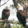 "Bald Eagles © 2015 Nova Mackentley Arcadia NP, ME  BEW  <div class=""ss-paypal-button""><div class=""ss-paypal-add-to-cart-section""><div class=""ss-paypal-product-options""><h4>Mat Sizes</h4><ul><li><a href=""https://www.paypal.com/cgi-bin/webscr?cmd=_cart&amp;business=T77V5VKCW4K2U&amp;lc=US&amp;item_name=Bald%20Eagles%20%C2%A9%202015%20Nova%20Mackentley%20Arcadia%20NP%2C%20ME%20%20BEW&amp;item_number=http%3A%2F%2Fwww.nightflightimages.com%2FGalleries-1%2FHawks%2Fi-Skd6LLp&amp;button_subtype=products&amp;no_note=0&amp;cn=Add%20special%20instructions%20to%20the%20seller%3A&amp;no_shipping=2&amp;currency_code=USD&amp;weight_unit=lbs&amp;add=1&amp;bn=PP-ShopCartBF%3Abtn_cart_SM.gif%3ANonHosted&amp;on0=Mat%20Sizes&amp;option_select0=5%20x%207&amp;option_amount0=10.00&amp;option_select1=8%20x%2010&amp;option_amount1=18.00&amp;option_select2=11%20x%2014&amp;option_amount2=28.00&amp;option_select3=card&amp;option_amount3=4.00&amp;option_index=0&amp;charset=utf-8&amp;submit=&amp;os0=5%20x%207"" target=""paypal""><span>5 x 7 $11.00 USD</span><img src=""https://www.paypalobjects.com/en_US/i/btn/btn_cart_SM.gif""></a></li><li><a href=""https://www.paypal.com/cgi-bin/webscr?cmd=_cart&amp;business=T77V5VKCW4K2U&amp;lc=US&amp;item_name=Bald%20Eagles%20%C2%A9%202015%20Nova%20Mackentley%20Arcadia%20NP%2C%20ME%20%20BEW&amp;item_number=http%3A%2F%2Fwww.nightflightimages.com%2FGalleries-1%2FHawks%2Fi-Skd6LLp&amp;button_subtype=products&amp;no_note=0&amp;cn=Add%20special%20instructions%20to%20the%20seller%3A&amp;no_shipping=2&amp;currency_code=USD&amp;weight_unit=lbs&amp;add=1&amp;bn=PP-ShopCartBF%3Abtn_cart_SM.gif%3ANonHosted&amp;on0=Mat%20Sizes&amp;option_select0=5%20x%207&amp;option_amount0=10.00&amp;option_select1=8%20x%2010&amp;option_amount1=18.00&amp;option_select2=11%20x%2014&amp;option_amount2=28.00&amp;option_select3=card&amp;option_amount3=4.00&amp;option_index=0&amp;charset=utf-8&amp;submit=&amp;os0=8%20x%2010"" target=""paypal""><span>8 x 10 $19.00 USD</span><img src=""https://www.paypalobjects.com/en_US/i/btn/btn_cart_SM.gif""></a></li><li><a href=""https://www.paypal.com/cgi-bin/webscr?cmd=_cart&amp;business=T77V5VKCW4K2U&amp;lc=US&amp;item_name=Bald%20Eagles%20%C2%A9%202015%20Nova%20Mackentley%20Arcadia%20NP%2C%20ME%20%20BEW&amp;item_number=http%3A%2F%2Fwww.nightflightimages.com%2FGalleries-1%2FHawks%2Fi-Skd6LLp&amp;button_subtype=products&amp;no_note=0&amp;cn=Add%20special%20instructions%20to%20the%20seller%3A&amp;no_shipping=2&amp;currency_code=USD&amp;weight_unit=lbs&amp;add=1&amp;bn=PP-ShopCartBF%3Abtn_cart_SM.gif%3ANonHosted&amp;on0=Mat%20Sizes&amp;option_select0=5%20x%207&amp;option_amount0=10.00&amp;option_select1=8%20x%2010&amp;option_amount1=18.00&amp;option_select2=11%20x%2014&amp;option_amount2=28.00&amp;option_select3=card&amp;option_amount3=4.00&amp;option_index=0&amp;charset=utf-8&amp;submit=&amp;os0=11%20x%2014"" target=""paypal""><span>11 x 14 $29.00 USD</span><img src=""https://www.paypalobjects.com/en_US/i/btn/btn_cart_SM.gif""></a></li><li><a href=""https://www.paypal.com/cgi-bin/webscr?cmd=_cart&amp;business=T77V5VKCW4K2U&amp;lc=US&amp;item_name=Bald%20Eagles%20%C2%A9%202015%20Nova%20Mackentley%20Arcadia%20NP%2C%20ME%20%20BEW&amp;item_number=http%3A%2F%2Fwww.nightflightimages.com%2FGalleries-1%2FHawks%2Fi-Skd6LLp&amp;button_subtype=products&amp;no_note=0&amp;cn=Add%20special%20instructions%20to%20the%20seller%3A&amp;no_shipping=2&amp;currency_code=USD&amp;weight_unit=lbs&amp;add=1&amp;bn=PP-ShopCartBF%3Abtn_cart_SM.gif%3ANonHosted&amp;on0=Mat%20Sizes&amp;option_select0=5%20x%207&amp;option_amount0=10.00&amp;option_select1=8%20x%2010&amp;option_amount1=18.00&amp;option_select2=11%20x%2014&amp;option_amount2=28.00&amp;option_select3=card&amp;option_amount3=4.00&amp;option_index=0&amp;charset=utf-8&amp;submit=&amp;os0=card"" target=""paypal""><span>card $5.00 USD</span><img src=""https://www.paypalobjects.com/en_US/i/btn/btn_cart_SM.gif""></a></li></ul></div></div> <div class=""ss-paypal-view-cart-section""><a href=""https://www.paypal.com/cgi-bin/webscr?cmd=_cart&amp;business=T77V5VKCW4K2U&amp;display=1&amp;item_name=Bald%20Eagles%20%C2%A9%202015%20Nova%20Mackentley%20Arcadia%20NP%2C%20ME%20%20BEW&amp;item_number=http%3A%2F%2Fwww.nightflightimages.com%2FGalleries-1%2FHawks%2Fi-Skd6LLp&amp;charset=utf-8&amp;submit="" target=""paypal"" class=""ss-paypal-submit-button""><img src=""https://www.paypalobjects.com/en_US/i/btn/btn_viewcart_LG.gif""></a></div></div><div class=""ss-paypal-button-end""></div>"