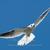 "White-tailed Kite © 2008 Nova Mackentley Laguna Atascosa NWR, TX WTG  <div class=""ss-paypal-button""><div class=""ss-paypal-add-to-cart-section""><div class=""ss-paypal-product-options""><h4>Mat Sizes</h4><ul><li><a href=""https://www.paypal.com/cgi-bin/webscr?cmd=_cart&amp;business=T77V5VKCW4K2U&amp;lc=US&amp;item_name=White-tailed%20Kite%20%C2%A9%202008%20Nova%20Mackentley%20Laguna%20Atascosa%20NWR%2C%20TX%20WTG&amp;item_number=http%3A%2F%2Fwww.nightflightimages.com%2FGalleries-1%2FHawks%2Fi-XqLDNvc&amp;button_subtype=products&amp;no_note=0&amp;cn=Add%20special%20instructions%20to%20the%20seller%3A&amp;no_shipping=2&amp;currency_code=USD&amp;weight_unit=lbs&amp;add=1&amp;bn=PP-ShopCartBF%3Abtn_cart_SM.gif%3ANonHosted&amp;on0=Mat%20Sizes&amp;option_select0=5%20x%207&amp;option_amount0=10.00&amp;option_select1=8%20x%2010&amp;option_amount1=18.00&amp;option_select2=11%20x%2014&amp;option_amount2=28.00&amp;option_select3=card&amp;option_amount3=4.00&amp;option_index=0&amp;charset=utf-8&amp;submit=&amp;os0=5%20x%207"" target=""paypal""><span>5 x 7 $11.00 USD</span><img src=""https://www.paypalobjects.com/en_US/i/btn/btn_cart_SM.gif""></a></li><li><a href=""https://www.paypal.com/cgi-bin/webscr?cmd=_cart&amp;business=T77V5VKCW4K2U&amp;lc=US&amp;item_name=White-tailed%20Kite%20%C2%A9%202008%20Nova%20Mackentley%20Laguna%20Atascosa%20NWR%2C%20TX%20WTG&amp;item_number=http%3A%2F%2Fwww.nightflightimages.com%2FGalleries-1%2FHawks%2Fi-XqLDNvc&amp;button_subtype=products&amp;no_note=0&amp;cn=Add%20special%20instructions%20to%20the%20seller%3A&amp;no_shipping=2&amp;currency_code=USD&amp;weight_unit=lbs&amp;add=1&amp;bn=PP-ShopCartBF%3Abtn_cart_SM.gif%3ANonHosted&amp;on0=Mat%20Sizes&amp;option_select0=5%20x%207&amp;option_amount0=10.00&amp;option_select1=8%20x%2010&amp;option_amount1=18.00&amp;option_select2=11%20x%2014&amp;option_amount2=28.00&amp;option_select3=card&amp;option_amount3=4.00&amp;option_index=0&amp;charset=utf-8&amp;submit=&amp;os0=8%20x%2010"" target=""paypal""><span>8 x 10 $19.00 USD</span><img src=""https://www.paypalobjects.com/en_US/i/btn/btn_cart_SM.gif""></a></li><li><a href=""https://www.paypal.com/cgi-bin/webscr?cmd=_cart&amp;business=T77V5VKCW4K2U&amp;lc=US&amp;item_name=White-tailed%20Kite%20%C2%A9%202008%20Nova%20Mackentley%20Laguna%20Atascosa%20NWR%2C%20TX%20WTG&amp;item_number=http%3A%2F%2Fwww.nightflightimages.com%2FGalleries-1%2FHawks%2Fi-XqLDNvc&amp;button_subtype=products&amp;no_note=0&amp;cn=Add%20special%20instructions%20to%20the%20seller%3A&amp;no_shipping=2&amp;currency_code=USD&amp;weight_unit=lbs&amp;add=1&amp;bn=PP-ShopCartBF%3Abtn_cart_SM.gif%3ANonHosted&amp;on0=Mat%20Sizes&amp;option_select0=5%20x%207&amp;option_amount0=10.00&amp;option_select1=8%20x%2010&amp;option_amount1=18.00&amp;option_select2=11%20x%2014&amp;option_amount2=28.00&amp;option_select3=card&amp;option_amount3=4.00&amp;option_index=0&amp;charset=utf-8&amp;submit=&amp;os0=11%20x%2014"" target=""paypal""><span>11 x 14 $29.00 USD</span><img src=""https://www.paypalobjects.com/en_US/i/btn/btn_cart_SM.gif""></a></li><li><a href=""https://www.paypal.com/cgi-bin/webscr?cmd=_cart&amp;business=T77V5VKCW4K2U&amp;lc=US&amp;item_name=White-tailed%20Kite%20%C2%A9%202008%20Nova%20Mackentley%20Laguna%20Atascosa%20NWR%2C%20TX%20WTG&amp;item_number=http%3A%2F%2Fwww.nightflightimages.com%2FGalleries-1%2FHawks%2Fi-XqLDNvc&amp;button_subtype=products&amp;no_note=0&amp;cn=Add%20special%20instructions%20to%20the%20seller%3A&amp;no_shipping=2&amp;currency_code=USD&amp;weight_unit=lbs&amp;add=1&amp;bn=PP-ShopCartBF%3Abtn_cart_SM.gif%3ANonHosted&amp;on0=Mat%20Sizes&amp;option_select0=5%20x%207&amp;option_amount0=10.00&amp;option_select1=8%20x%2010&amp;option_amount1=18.00&amp;option_select2=11%20x%2014&amp;option_amount2=28.00&amp;option_select3=card&amp;option_amount3=4.00&amp;option_index=0&amp;charset=utf-8&amp;submit=&amp;os0=card"" target=""paypal""><span>card $5.00 USD</span><img src=""https://www.paypalobjects.com/en_US/i/btn/btn_cart_SM.gif""></a></li></ul></div></div> <div class=""ss-paypal-view-cart-section""><a href=""https://www.paypal.com/cgi-bin/webscr?cmd=_cart&amp;business=T77V5VKCW4K2U&amp;display=1&amp;item_name=White-tailed%20Kite%20%C2%A9%202008%20Nova%20Mackentley%20Laguna%20Atascosa%20NWR%2C%20TX%20WTG&amp;item_number=http%3A%2F%2Fwww.nightflightimages.com%2FGalleries-1%2FHawks%2Fi-XqLDNvc&amp;charset=utf-8&amp;submit="" target=""paypal"" class=""ss-paypal-submit-button""><img src=""https://www.paypalobjects.com/en_US/i/btn/btn_viewcart_LG.gif""></a></div></div><div class=""ss-paypal-button-end""></div>"