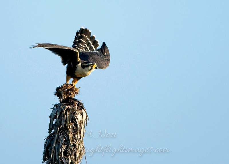 """Aplomado Falcon © 2009 C. M. Neri. Laguna Atascosa NWR, TX APFLTO  <div class=""""ss-paypal-button""""><div class=""""ss-paypal-add-to-cart-section""""><div class=""""ss-paypal-product-options""""><h4>Mat Sizes</h4><ul><li><a href=""""https://www.paypal.com/cgi-bin/webscr?cmd=_cart&business=T77V5VKCW4K2U&lc=US&item_name=Aplomado%20Falcon%20%C2%A9%202009%20C.%20M.%20Neri.%20Laguna%20Atascosa%20NWR%2C%20TX%20APFLTO&item_number=http%3A%2F%2Fwww.nightflightimages.com%2FGalleries-1%2FHawks%2Fi-Zbdb8dd&button_subtype=products&no_note=0&cn=Add%20special%20instructions%20to%20the%20seller%3A&no_shipping=2&currency_code=USD&weight_unit=lbs&add=1&bn=PP-ShopCartBF%3Abtn_cart_SM.gif%3ANonHosted&on0=Mat%20Sizes&option_select0=5%20x%207&option_amount0=10.00&option_select1=8%20x%2010&option_amount1=18.00&option_select2=11%20x%2014&option_amount2=28.00&option_select3=card&option_amount3=4.00&option_index=0&charset=utf-8&submit=&os0=5%20x%207"""" target=""""paypal""""><span>5 x 7 $11.00 USD</span><img src=""""https://www.paypalobjects.com/en_US/i/btn/btn_cart_SM.gif""""></a></li><li><a href=""""https://www.paypal.com/cgi-bin/webscr?cmd=_cart&business=T77V5VKCW4K2U&lc=US&item_name=Aplomado%20Falcon%20%C2%A9%202009%20C.%20M.%20Neri.%20Laguna%20Atascosa%20NWR%2C%20TX%20APFLTO&item_number=http%3A%2F%2Fwww.nightflightimages.com%2FGalleries-1%2FHawks%2Fi-Zbdb8dd&button_subtype=products&no_note=0&cn=Add%20special%20instructions%20to%20the%20seller%3A&no_shipping=2&currency_code=USD&weight_unit=lbs&add=1&bn=PP-ShopCartBF%3Abtn_cart_SM.gif%3ANonHosted&on0=Mat%20Sizes&option_select0=5%20x%207&option_amount0=10.00&option_select1=8%20x%2010&option_amount1=18.00&option_select2=11%20x%2014&option_amount2=28.00&option_select3=card&option_amount3=4.00&option_index=0&charset=utf-8&submit=&os0=8%20x%2010"""" target=""""paypal""""><span>8 x 10 $19.00 USD</span><img src=""""https://www.paypalobjects.com/en_US/i/btn/btn_cart_SM.gif""""></a></li><li><a href=""""https://www.paypal.com/cgi-bin/webscr?cmd=_cart&business=T77V5VKCW4K2U&lc=US&item_name=Aplomado%20Fa"""