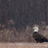 "Bald Eagle © 2012 C. M. Neri Hawk Ridge, MN BAEAMV  <div class=""ss-paypal-button""><div class=""ss-paypal-add-to-cart-section""><div class=""ss-paypal-product-options""><h4>Mat Sizes</h4><ul><li><a href=""https://www.paypal.com/cgi-bin/webscr?cmd=_cart&business=T77V5VKCW4K2U&lc=US&item_name=Bald%20Eagle%20%C2%A9%202012%20C.%20M.%20Neri%20Hawk%20Ridge%2C%20MN%20BAEAMV&item_number=http%3A%2F%2Fwww.nightflightimages.com%2FGalleries-1%2FHawks%2Fi-ZmNgzTm&button_subtype=products&no_note=0&cn=Add%20special%20instructions%20to%20the%20seller%3A&no_shipping=2&currency_code=USD&weight_unit=lbs&add=1&bn=PP-ShopCartBF%3Abtn_cart_SM.gif%3ANonHosted&on0=Mat%20Sizes&option_select0=5%20x%207&option_amount0=10.00&option_select1=8%20x%2010&option_amount1=18.00&option_select2=11%20x%2014&option_amount2=28.00&option_select3=card&option_amount3=4.00&option_index=0&charset=utf-8&submit=&os0=5%20x%207"" target=""paypal""><span>5 x 7 $11.00 USD</span><img src=""https://www.paypalobjects.com/en_US/i/btn/btn_cart_SM.gif""></a></li><li><a href=""https://www.paypal.com/cgi-bin/webscr?cmd=_cart&business=T77V5VKCW4K2U&lc=US&item_name=Bald%20Eagle%20%C2%A9%202012%20C.%20M.%20Neri%20Hawk%20Ridge%2C%20MN%20BAEAMV&item_number=http%3A%2F%2Fwww.nightflightimages.com%2FGalleries-1%2FHawks%2Fi-ZmNgzTm&button_subtype=products&no_note=0&cn=Add%20special%20instructions%20to%20the%20seller%3A&no_shipping=2&currency_code=USD&weight_unit=lbs&add=1&bn=PP-ShopCartBF%3Abtn_cart_SM.gif%3ANonHosted&on0=Mat%20Sizes&option_select0=5%20x%207&option_amount0=10.00&option_select1=8%20x%2010&option_amount1=18.00&option_select2=11%20x%2014&option_amount2=28.00&option_select3=card&option_amount3=4.00&option_index=0&charset=utf-8&submit=&os0=8%20x%2010"" target=""paypal""><span>8 x 10 $19.00 USD</span><img src=""https://www.paypalobjects.com/en_US/i/btn/btn_cart_SM.gif""></a></li><li><a href=""https://www.paypal.com/cgi-bin/webscr?cmd=_cart&business=T77V5VKCW4K2U&lc=US&item_name=Bald%20Eagle%20%C2%A9%202012%20C.%20M.%20Neri%20Hawk%20Ridge%2C%20MN%20BAEAMV&item_number=http%3A%2F%2Fwww.nightflightimages.com%2FGalleries-1%2FHawks%2Fi-ZmNgzTm&button_subtype=products&no_note=0&cn=Add%20special%20instructions%20to%20the%20seller%3A&no_shipping=2&currency_code=USD&weight_unit=lbs&add=1&bn=PP-ShopCartBF%3Abtn_cart_SM.gif%3ANonHosted&on0=Mat%20Sizes&option_select0=5%20x%207&option_amount0=10.00&option_select1=8%20x%2010&option_amount1=18.00&option_select2=11%20x%2014&option_amount2=28.00&option_select3=card&option_amount3=4.00&option_index=0&charset=utf-8&submit=&os0=11%20x%2014"" target=""paypal""><span>11 x 14 $29.00 USD</span><img src=""https://www.paypalobjects.com/en_US/i/btn/btn_cart_SM.gif""></a></li><li><a href=""https://www.paypal.com/cgi-bin/webscr?cmd=_cart&business=T77V5VKCW4K2U&lc=US&item_name=Bald%20Eagle%20%C2%A9%202012%20C.%20M.%20Neri%20Hawk%20Ridge%2C%20MN%20BAEAMV&item_number=http%3A%2F%2Fwww.nightflightimages.com%2FGalleries-1%2FHawks%2Fi-ZmNgzTm&button_subtype=products&no_note=0&cn=Add%20special%20instructions%20to%20the%20seller%3A&no_shipping=2&currency_code=USD&weight_unit=lbs&add=1&bn=PP-ShopCartBF%3Abtn_cart_SM.gif%3ANonHosted&on0=Mat%20Sizes&option_select0=5%20x%207&option_amount0=10.00&option_select1=8%20x%2010&option_amount1=18.00&option_select2=11%20x%2014&option_amount2=28.00&option_select3=card&option_amount3=4.00&option_index=0&charset=utf-8&submit=&os0=card"" target=""paypal""><span>card $5.00 USD</span><img src=""https://www.paypalobjects.com/en_US/i/btn/btn_cart_SM.gif""></a></li></ul></div></div> <div class=""ss-paypal-view-cart-section""><a href=""https://www.paypal.com/cgi-bin/webscr?cmd=_cart&business=T77V5VKCW4K2U&display=1&item_name=Bald%20Eagle%20%C2%A9%202012%20C.%20M.%20Neri%20Hawk%20Ridge%2C%20MN%20BAEAMV&item_number=http%3A%2F%2Fwww.nightflightimages.com%2FGalleries-1%2FHawks%2Fi-ZmNgzTm&charset=utf-8&submit="" target=""paypal"" class=""ss-paypal-submit-button""><img src=""https://www.paypalobjects.com/en_US/i/btn/btn_viewcart_LG.gif""></a></div></div><div class=""ss-paypal-button-end""></div>"