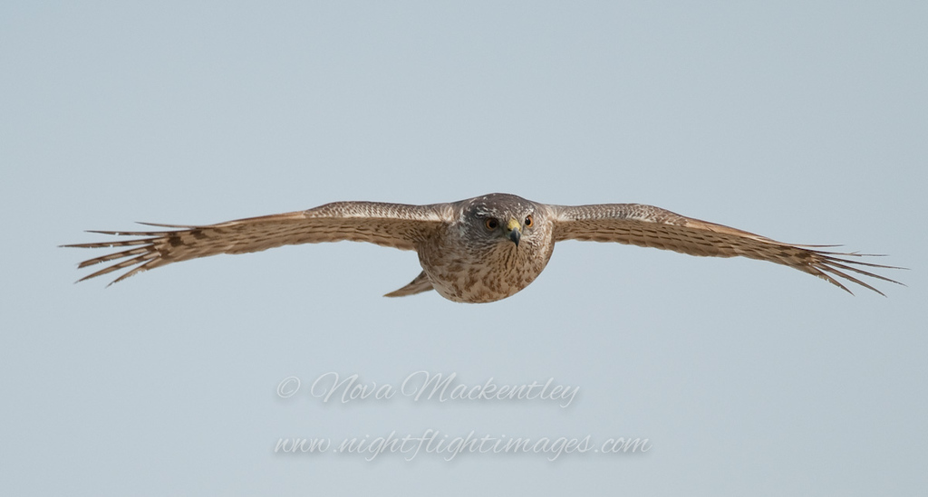 """Sharp-shinned Hawk © 2010 Nova Mackentley Whitefish Point, MI SSH  <div class=""""ss-paypal-button""""><div class=""""ss-paypal-add-to-cart-section""""><div class=""""ss-paypal-product-options""""><h4>Mat Sizes</h4><ul><li><a href=""""https://www.paypal.com/cgi-bin/webscr?cmd=_cart&business=T77V5VKCW4K2U&lc=US&item_name=Sharp-shinned%20Hawk%20%C2%A9%202010%20Nova%20Mackentley%20Whitefish%20Point%2C%20MI%20SSH&item_number=http%3A%2F%2Fwww.nightflightimages.com%2FGalleries-1%2FHawks%2Fi-bnFwk3p&button_subtype=products&no_note=0&cn=Add%20special%20instructions%20to%20the%20seller%3A&no_shipping=2&currency_code=USD&weight_unit=lbs&add=1&bn=PP-ShopCartBF%3Abtn_cart_SM.gif%3ANonHosted&on0=Mat%20Sizes&option_select0=5%20x%207&option_amount0=10.00&option_select1=8%20x%2010&option_amount1=18.00&option_select2=11%20x%2014&option_amount2=28.00&option_select3=card&option_amount3=4.00&option_index=0&charset=utf-8&submit=&os0=5%20x%207"""" target=""""paypal""""><span>5 x 7 $11.00 USD</span><img src=""""https://www.paypalobjects.com/en_US/i/btn/btn_cart_SM.gif""""></a></li><li><a href=""""https://www.paypal.com/cgi-bin/webscr?cmd=_cart&business=T77V5VKCW4K2U&lc=US&item_name=Sharp-shinned%20Hawk%20%C2%A9%202010%20Nova%20Mackentley%20Whitefish%20Point%2C%20MI%20SSH&item_number=http%3A%2F%2Fwww.nightflightimages.com%2FGalleries-1%2FHawks%2Fi-bnFwk3p&button_subtype=products&no_note=0&cn=Add%20special%20instructions%20to%20the%20seller%3A&no_shipping=2&currency_code=USD&weight_unit=lbs&add=1&bn=PP-ShopCartBF%3Abtn_cart_SM.gif%3ANonHosted&on0=Mat%20Sizes&option_select0=5%20x%207&option_amount0=10.00&option_select1=8%20x%2010&option_amount1=18.00&option_select2=11%20x%2014&option_amount2=28.00&option_select3=card&option_amount3=4.00&option_index=0&charset=utf-8&submit=&os0=8%20x%2010"""" target=""""paypal""""><span>8 x 10 $19.00 USD</span><img src=""""https://www.paypalobjects.com/en_US/i/btn/btn_cart_SM.gif""""></a></li><li><a href=""""https://www.paypal.com/cgi-bin/webscr?cmd=_cart&business=T77V5VKCW4K2U&lc=US&item_name=Sharp-shinned%20Hawk%"""