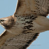 "Red-tailed Hawk © 2013 Nova Mackentley Whitefish Point, MI RTP  <div class=""ss-paypal-button""><div class=""ss-paypal-add-to-cart-section""><div class=""ss-paypal-product-options""><h4>Mat Sizes</h4><ul><li><a href=""https://www.paypal.com/cgi-bin/webscr?cmd=_cart&amp;business=T77V5VKCW4K2U&amp;lc=US&amp;item_name=Red-tailed%20Hawk%20%C2%A9%202013%20Nova%20Mackentley%20Whitefish%20Point%2C%20MI%20RTP&amp;item_number=http%3A%2F%2Fwww.nightflightimages.com%2FGalleries-1%2FHawks%2Fi-cdJcLQg&amp;button_subtype=products&amp;no_note=0&amp;cn=Add%20special%20instructions%20to%20the%20seller%3A&amp;no_shipping=2&amp;currency_code=USD&amp;weight_unit=lbs&amp;add=1&amp;bn=PP-ShopCartBF%3Abtn_cart_SM.gif%3ANonHosted&amp;on0=Mat%20Sizes&amp;option_select0=5%20x%207&amp;option_amount0=10.00&amp;option_select1=8%20x%2010&amp;option_amount1=18.00&amp;option_select2=11%20x%2014&amp;option_amount2=28.00&amp;option_select3=card&amp;option_amount3=4.00&amp;option_index=0&amp;charset=utf-8&amp;submit=&amp;os0=5%20x%207"" target=""paypal""><span>5 x 7 $11.00 USD</span><img src=""https://www.paypalobjects.com/en_US/i/btn/btn_cart_SM.gif""></a></li><li><a href=""https://www.paypal.com/cgi-bin/webscr?cmd=_cart&amp;business=T77V5VKCW4K2U&amp;lc=US&amp;item_name=Red-tailed%20Hawk%20%C2%A9%202013%20Nova%20Mackentley%20Whitefish%20Point%2C%20MI%20RTP&amp;item_number=http%3A%2F%2Fwww.nightflightimages.com%2FGalleries-1%2FHawks%2Fi-cdJcLQg&amp;button_subtype=products&amp;no_note=0&amp;cn=Add%20special%20instructions%20to%20the%20seller%3A&amp;no_shipping=2&amp;currency_code=USD&amp;weight_unit=lbs&amp;add=1&amp;bn=PP-ShopCartBF%3Abtn_cart_SM.gif%3ANonHosted&amp;on0=Mat%20Sizes&amp;option_select0=5%20x%207&amp;option_amount0=10.00&amp;option_select1=8%20x%2010&amp;option_amount1=18.00&amp;option_select2=11%20x%2014&amp;option_amount2=28.00&amp;option_select3=card&amp;option_amount3=4.00&amp;option_index=0&amp;charset=utf-8&amp;submit=&amp;os0=8%20x%2010"" target=""paypal""><span>8 x 10 $19.00 USD</span><img src=""https://www.paypalobjects.com/en_US/i/btn/btn_cart_SM.gif""></a></li><li><a href=""https://www.paypal.com/cgi-bin/webscr?cmd=_cart&amp;business=T77V5VKCW4K2U&amp;lc=US&amp;item_name=Red-tailed%20Hawk%20%C2%A9%202013%20Nova%20Mackentley%20Whitefish%20Point%2C%20MI%20RTP&amp;item_number=http%3A%2F%2Fwww.nightflightimages.com%2FGalleries-1%2FHawks%2Fi-cdJcLQg&amp;button_subtype=products&amp;no_note=0&amp;cn=Add%20special%20instructions%20to%20the%20seller%3A&amp;no_shipping=2&amp;currency_code=USD&amp;weight_unit=lbs&amp;add=1&amp;bn=PP-ShopCartBF%3Abtn_cart_SM.gif%3ANonHosted&amp;on0=Mat%20Sizes&amp;option_select0=5%20x%207&amp;option_amount0=10.00&amp;option_select1=8%20x%2010&amp;option_amount1=18.00&amp;option_select2=11%20x%2014&amp;option_amount2=28.00&amp;option_select3=card&amp;option_amount3=4.00&amp;option_index=0&amp;charset=utf-8&amp;submit=&amp;os0=11%20x%2014"" target=""paypal""><span>11 x 14 $29.00 USD</span><img src=""https://www.paypalobjects.com/en_US/i/btn/btn_cart_SM.gif""></a></li><li><a href=""https://www.paypal.com/cgi-bin/webscr?cmd=_cart&amp;business=T77V5VKCW4K2U&amp;lc=US&amp;item_name=Red-tailed%20Hawk%20%C2%A9%202013%20Nova%20Mackentley%20Whitefish%20Point%2C%20MI%20RTP&amp;item_number=http%3A%2F%2Fwww.nightflightimages.com%2FGalleries-1%2FHawks%2Fi-cdJcLQg&amp;button_subtype=products&amp;no_note=0&amp;cn=Add%20special%20instructions%20to%20the%20seller%3A&amp;no_shipping=2&amp;currency_code=USD&amp;weight_unit=lbs&amp;add=1&amp;bn=PP-ShopCartBF%3Abtn_cart_SM.gif%3ANonHosted&amp;on0=Mat%20Sizes&amp;option_select0=5%20x%207&amp;option_amount0=10.00&amp;option_select1=8%20x%2010&amp;option_amount1=18.00&amp;option_select2=11%20x%2014&amp;option_amount2=28.00&amp;option_select3=card&amp;option_amount3=4.00&amp;option_index=0&amp;charset=utf-8&amp;submit=&amp;os0=card"" target=""paypal""><span>card $5.00 USD</span><img src=""https://www.paypalobjects.com/en_US/i/btn/btn_cart_SM.gif""></a></li></ul></div></div> <div class=""ss-paypal-view-cart-section""><a href=""https://www.paypal.com/cgi-bin/webscr?cmd=_cart&amp;business=T77V5VKCW4K2U&amp;display=1&amp;item_name=Red-tailed%20Hawk%20%C2%A9%202013%20Nova%20Mackentley%20Whitefish%20Point%2C%20MI%20RTP&amp;item_number=http%3A%2F%2Fwww.nightflightimages.com%2FGalleries-1%2FHawks%2Fi-cdJcLQg&amp;charset=utf-8&amp;submit="" target=""paypal"" class=""ss-paypal-submit-button""><img src=""https://www.paypalobjects.com/en_US/i/btn/btn_viewcart_LG.gif""></a></div></div><div class=""ss-paypal-button-end""></div>"