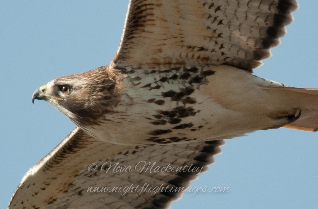 """Red-tailed Hawk © 2013 Nova Mackentley Whitefish Point, MI RTP  <div class=""""ss-paypal-button""""><div class=""""ss-paypal-add-to-cart-section""""><div class=""""ss-paypal-product-options""""><h4>Mat Sizes</h4><ul><li><a href=""""https://www.paypal.com/cgi-bin/webscr?cmd=_cart&business=T77V5VKCW4K2U&lc=US&item_name=Red-tailed%20Hawk%20%C2%A9%202013%20Nova%20Mackentley%20Whitefish%20Point%2C%20MI%20RTP&item_number=http%3A%2F%2Fwww.nightflightimages.com%2FGalleries-1%2FHawks%2Fi-cdJcLQg&button_subtype=products&no_note=0&cn=Add%20special%20instructions%20to%20the%20seller%3A&no_shipping=2&currency_code=USD&weight_unit=lbs&add=1&bn=PP-ShopCartBF%3Abtn_cart_SM.gif%3ANonHosted&on0=Mat%20Sizes&option_select0=5%20x%207&option_amount0=10.00&option_select1=8%20x%2010&option_amount1=18.00&option_select2=11%20x%2014&option_amount2=28.00&option_select3=card&option_amount3=4.00&option_index=0&charset=utf-8&submit=&os0=5%20x%207"""" target=""""paypal""""><span>5 x 7 $11.00 USD</span><img src=""""https://www.paypalobjects.com/en_US/i/btn/btn_cart_SM.gif""""></a></li><li><a href=""""https://www.paypal.com/cgi-bin/webscr?cmd=_cart&business=T77V5VKCW4K2U&lc=US&item_name=Red-tailed%20Hawk%20%C2%A9%202013%20Nova%20Mackentley%20Whitefish%20Point%2C%20MI%20RTP&item_number=http%3A%2F%2Fwww.nightflightimages.com%2FGalleries-1%2FHawks%2Fi-cdJcLQg&button_subtype=products&no_note=0&cn=Add%20special%20instructions%20to%20the%20seller%3A&no_shipping=2&currency_code=USD&weight_unit=lbs&add=1&bn=PP-ShopCartBF%3Abtn_cart_SM.gif%3ANonHosted&on0=Mat%20Sizes&option_select0=5%20x%207&option_amount0=10.00&option_select1=8%20x%2010&option_amount1=18.00&option_select2=11%20x%2014&option_amount2=28.00&option_select3=card&option_amount3=4.00&option_index=0&charset=utf-8&submit=&os0=8%20x%2010"""" target=""""paypal""""><span>8 x 10 $19.00 USD</span><img src=""""https://www.paypalobjects.com/en_US/i/btn/btn_cart_SM.gif""""></a></li><li><a href=""""https://www.paypal.com/cgi-bin/webscr?cmd=_cart&business=T77V5VKCW4K2U&lc=US&item_name=Red-tailed%20Hawk%20%C2%A9%202"""