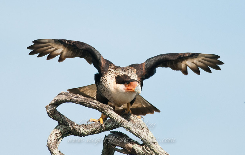 "Caracara © 2010 Nova Mackentley Laguna Atascosa NWR, TX CAR  <div class=""ss-paypal-button""><div class=""ss-paypal-add-to-cart-section""><div class=""ss-paypal-product-options""><h4>Mat Sizes</h4><ul><li><a href=""https://www.paypal.com/cgi-bin/webscr?cmd=_cart&business=T77V5VKCW4K2U&lc=US&item_name=Caracara%20%C2%A9%202010%20Nova%20Mackentley%20Laguna%20Atascosa%20NWR%2C%20TX%20CAR&item_number=http%3A%2F%2Fwww.nightflightimages.com%2FGalleries-1%2FHawks%2Fi-cjgHjtq&button_subtype=products&no_note=0&cn=Add%20special%20instructions%20to%20the%20seller%3A&no_shipping=2&currency_code=USD&weight_unit=lbs&add=1&bn=PP-ShopCartBF%3Abtn_cart_SM.gif%3ANonHosted&on0=Mat%20Sizes&option_select0=5%20x%207&option_amount0=10.00&option_select1=8%20x%2010&option_amount1=18.00&option_select2=11%20x%2014&option_amount2=28.00&option_select3=card&option_amount3=4.00&option_index=0&charset=utf-8&submit=&os0=5%20x%207"" target=""paypal""><span>5 x 7 $11.00 USD</span><img src=""https://www.paypalobjects.com/en_US/i/btn/btn_cart_SM.gif""></a></li><li><a href=""https://www.paypal.com/cgi-bin/webscr?cmd=_cart&business=T77V5VKCW4K2U&lc=US&item_name=Caracara%20%C2%A9%202010%20Nova%20Mackentley%20Laguna%20Atascosa%20NWR%2C%20TX%20CAR&item_number=http%3A%2F%2Fwww.nightflightimages.com%2FGalleries-1%2FHawks%2Fi-cjgHjtq&button_subtype=products&no_note=0&cn=Add%20special%20instructions%20to%20the%20seller%3A&no_shipping=2&currency_code=USD&weight_unit=lbs&add=1&bn=PP-ShopCartBF%3Abtn_cart_SM.gif%3ANonHosted&on0=Mat%20Sizes&option_select0=5%20x%207&option_amount0=10.00&option_select1=8%20x%2010&option_amount1=18.00&option_select2=11%20x%2014&option_amount2=28.00&option_select3=card&option_amount3=4.00&option_index=0&charset=utf-8&submit=&os0=8%20x%2010"" target=""paypal""><span>8 x 10 $19.00 USD</span><img src=""https://www.paypalobjects.com/en_US/i/btn/btn_cart_SM.gif""></a></li><li><a href=""https://www.paypal.com/cgi-bin/webscr?cmd=_cart&business=T77V5VKCW4K2U&lc=US&item_name=Caracara%20%C2%A9%202010%20Nova%20Mackentley%20Laguna%20Atascosa%20NWR%2C%20TX%20CAR&item_number=http%3A%2F%2Fwww.nightflightimages.com%2FGalleries-1%2FHawks%2Fi-cjgHjtq&button_subtype=products&no_note=0&cn=Add%20special%20instructions%20to%20the%20seller%3A&no_shipping=2&currency_code=USD&weight_unit=lbs&add=1&bn=PP-ShopCartBF%3Abtn_cart_SM.gif%3ANonHosted&on0=Mat%20Sizes&option_select0=5%20x%207&option_amount0=10.00&option_select1=8%20x%2010&option_amount1=18.00&option_select2=11%20x%2014&option_amount2=28.00&option_select3=card&option_amount3=4.00&option_index=0&charset=utf-8&submit=&os0=11%20x%2014"" target=""paypal""><span>11 x 14 $29.00 USD</span><img src=""https://www.paypalobjects.com/en_US/i/btn/btn_cart_SM.gif""></a></li><li><a href=""https://www.paypal.com/cgi-bin/webscr?cmd=_cart&business=T77V5VKCW4K2U&lc=US&item_name=Caracara%20%C2%A9%202010%20Nova%20Mackentley%20Laguna%20Atascosa%20NWR%2C%20TX%20CAR&item_number=http%3A%2F%2Fwww.nightflightimages.com%2FGalleries-1%2FHawks%2Fi-cjgHjtq&button_subtype=products&no_note=0&cn=Add%20special%20instructions%20to%20the%20seller%3A&no_shipping=2&currency_code=USD&weight_unit=lbs&add=1&bn=PP-ShopCartBF%3Abtn_cart_SM.gif%3ANonHosted&on0=Mat%20Sizes&option_select0=5%20x%207&option_amount0=10.00&option_select1=8%20x%2010&option_amount1=18.00&option_select2=11%20x%2014&option_amount2=28.00&option_select3=card&option_amount3=4.00&option_index=0&charset=utf-8&submit=&os0=card"" target=""paypal""><span>card $5.00 USD</span><img src=""https://www.paypalobjects.com/en_US/i/btn/btn_cart_SM.gif""></a></li></ul></div></div> <div class=""ss-paypal-view-cart-section""><a href=""https://www.paypal.com/cgi-bin/webscr?cmd=_cart&business=T77V5VKCW4K2U&display=1&item_name=Caracara%20%C2%A9%202010%20Nova%20Mackentley%20Laguna%20Atascosa%20NWR%2C%20TX%20CAR&item_number=http%3A%2F%2Fwww.nightflightimages.com%2FGalleries-1%2FHawks%2Fi-cjgHjtq&charset=utf-8&submit="" target=""paypal"" class=""ss-paypal-submit-button""><img src=""https://www.paypalobjects.com/en_US/i/btn/btn_viewcart_LG.gif""></a></div></div><div class=""ss-paypal-button-end""></div>"
