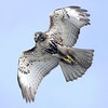 "Red-tailed Hawk © 2008 C. M. Neri.  Whitefish Point, MI RTHAWP08  <div class=""ss-paypal-button""><div class=""ss-paypal-add-to-cart-section""><div class=""ss-paypal-product-options""><h4>Mat Sizes</h4><ul><li><a href=""https://www.paypal.com/cgi-bin/webscr?cmd=_cart&amp;business=T77V5VKCW4K2U&amp;lc=US&amp;item_name=Red-tailed%20Hawk%20%C2%A9%202008%20C.%20M.%20Neri.%20%20Whitefish%20Point%2C%20MI%20RTHAWP08&amp;item_number=http%3A%2F%2Fwww.nightflightimages.com%2FGalleries-1%2FHawks%2Fi-d72rK6T&amp;button_subtype=products&amp;no_note=0&amp;cn=Add%20special%20instructions%20to%20the%20seller%3A&amp;no_shipping=2&amp;currency_code=USD&amp;weight_unit=lbs&amp;add=1&amp;bn=PP-ShopCartBF%3Abtn_cart_SM.gif%3ANonHosted&amp;on0=Mat%20Sizes&amp;option_select0=5%20x%207&amp;option_amount0=10.00&amp;option_select1=8%20x%2010&amp;option_amount1=18.00&amp;option_select2=11%20x%2014&amp;option_amount2=28.00&amp;option_select3=card&amp;option_amount3=4.00&amp;option_index=0&amp;charset=utf-8&amp;submit=&amp;os0=5%20x%207"" target=""paypal""><span>5 x 7 $11.00 USD</span><img src=""https://www.paypalobjects.com/en_US/i/btn/btn_cart_SM.gif""></a></li><li><a href=""https://www.paypal.com/cgi-bin/webscr?cmd=_cart&amp;business=T77V5VKCW4K2U&amp;lc=US&amp;item_name=Red-tailed%20Hawk%20%C2%A9%202008%20C.%20M.%20Neri.%20%20Whitefish%20Point%2C%20MI%20RTHAWP08&amp;item_number=http%3A%2F%2Fwww.nightflightimages.com%2FGalleries-1%2FHawks%2Fi-d72rK6T&amp;button_subtype=products&amp;no_note=0&amp;cn=Add%20special%20instructions%20to%20the%20seller%3A&amp;no_shipping=2&amp;currency_code=USD&amp;weight_unit=lbs&amp;add=1&amp;bn=PP-ShopCartBF%3Abtn_cart_SM.gif%3ANonHosted&amp;on0=Mat%20Sizes&amp;option_select0=5%20x%207&amp;option_amount0=10.00&amp;option_select1=8%20x%2010&amp;option_amount1=18.00&amp;option_select2=11%20x%2014&amp;option_amount2=28.00&amp;option_select3=card&amp;option_amount3=4.00&amp;option_index=0&amp;charset=utf-8&amp;submit=&amp;os0=8%20x%2010"" target=""paypal""><span>8 x 10 $19.00 USD</span><img src=""https://www.paypalobjects.com/en_US/i/btn/btn_cart_SM.gif""></a></li><li><a href=""https://www.paypal.com/cgi-bin/webscr?cmd=_cart&amp;business=T77V5VKCW4K2U&amp;lc=US&amp;item_name=Red-tailed%20Hawk%20%C2%A9%202008%20C.%20M.%20Neri.%20%20Whitefish%20Point%2C%20MI%20RTHAWP08&amp;item_number=http%3A%2F%2Fwww.nightflightimages.com%2FGalleries-1%2FHawks%2Fi-d72rK6T&amp;button_subtype=products&amp;no_note=0&amp;cn=Add%20special%20instructions%20to%20the%20seller%3A&amp;no_shipping=2&amp;currency_code=USD&amp;weight_unit=lbs&amp;add=1&amp;bn=PP-ShopCartBF%3Abtn_cart_SM.gif%3ANonHosted&amp;on0=Mat%20Sizes&amp;option_select0=5%20x%207&amp;option_amount0=10.00&amp;option_select1=8%20x%2010&amp;option_amount1=18.00&amp;option_select2=11%20x%2014&amp;option_amount2=28.00&amp;option_select3=card&amp;option_amount3=4.00&amp;option_index=0&amp;charset=utf-8&amp;submit=&amp;os0=11%20x%2014"" target=""paypal""><span>11 x 14 $29.00 USD</span><img src=""https://www.paypalobjects.com/en_US/i/btn/btn_cart_SM.gif""></a></li><li><a href=""https://www.paypal.com/cgi-bin/webscr?cmd=_cart&amp;business=T77V5VKCW4K2U&amp;lc=US&amp;item_name=Red-tailed%20Hawk%20%C2%A9%202008%20C.%20M.%20Neri.%20%20Whitefish%20Point%2C%20MI%20RTHAWP08&amp;item_number=http%3A%2F%2Fwww.nightflightimages.com%2FGalleries-1%2FHawks%2Fi-d72rK6T&amp;button_subtype=products&amp;no_note=0&amp;cn=Add%20special%20instructions%20to%20the%20seller%3A&amp;no_shipping=2&amp;currency_code=USD&amp;weight_unit=lbs&amp;add=1&amp;bn=PP-ShopCartBF%3Abtn_cart_SM.gif%3ANonHosted&amp;on0=Mat%20Sizes&amp;option_select0=5%20x%207&amp;option_amount0=10.00&amp;option_select1=8%20x%2010&amp;option_amount1=18.00&amp;option_select2=11%20x%2014&amp;option_amount2=28.00&amp;option_select3=card&amp;option_amount3=4.00&amp;option_index=0&amp;charset=utf-8&amp;submit=&amp;os0=card"" target=""paypal""><span>card $5.00 USD</span><img src=""https://www.paypalobjects.com/en_US/i/btn/btn_cart_SM.gif""></a></li></ul></div></div> <div class=""ss-paypal-view-cart-section""><a href=""https://www.paypal.com/cgi-bin/webscr?cmd=_cart&amp;business=T77V5VKCW4K2U&amp;display=1&amp;item_name=Red-tailed%20Hawk%20%C2%A9%202008%20C.%20M.%20Neri.%20%20Whitefish%20Point%2C%20MI%20RTHAWP08&amp;item_number=http%3A%2F%2Fwww.nightflightimages.com%2FGalleries-1%2FHawks%2Fi-d72rK6T&amp;charset=utf-8&amp;submit="" target=""paypal"" class=""ss-paypal-submit-button""><img src=""https://www.paypalobjects.com/en_US/i/btn/btn_viewcart_LG.gif""></a></div></div><div class=""ss-paypal-button-end""></div>"