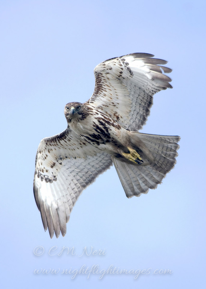 """Red-tailed Hawk © 2008 C. M. Neri.  Whitefish Point, MI RTHAWP08  <div class=""""ss-paypal-button""""><div class=""""ss-paypal-add-to-cart-section""""><div class=""""ss-paypal-product-options""""><h4>Mat Sizes</h4><ul><li><a href=""""https://www.paypal.com/cgi-bin/webscr?cmd=_cart&business=T77V5VKCW4K2U&lc=US&item_name=Red-tailed%20Hawk%20%C2%A9%202008%20C.%20M.%20Neri.%20%20Whitefish%20Point%2C%20MI%20RTHAWP08&item_number=http%3A%2F%2Fwww.nightflightimages.com%2FGalleries-1%2FHawks%2Fi-d72rK6T&button_subtype=products&no_note=0&cn=Add%20special%20instructions%20to%20the%20seller%3A&no_shipping=2&currency_code=USD&weight_unit=lbs&add=1&bn=PP-ShopCartBF%3Abtn_cart_SM.gif%3ANonHosted&on0=Mat%20Sizes&option_select0=5%20x%207&option_amount0=10.00&option_select1=8%20x%2010&option_amount1=18.00&option_select2=11%20x%2014&option_amount2=28.00&option_select3=card&option_amount3=4.00&option_index=0&charset=utf-8&submit=&os0=5%20x%207"""" target=""""paypal""""><span>5 x 7 $11.00 USD</span><img src=""""https://www.paypalobjects.com/en_US/i/btn/btn_cart_SM.gif""""></a></li><li><a href=""""https://www.paypal.com/cgi-bin/webscr?cmd=_cart&business=T77V5VKCW4K2U&lc=US&item_name=Red-tailed%20Hawk%20%C2%A9%202008%20C.%20M.%20Neri.%20%20Whitefish%20Point%2C%20MI%20RTHAWP08&item_number=http%3A%2F%2Fwww.nightflightimages.com%2FGalleries-1%2FHawks%2Fi-d72rK6T&button_subtype=products&no_note=0&cn=Add%20special%20instructions%20to%20the%20seller%3A&no_shipping=2&currency_code=USD&weight_unit=lbs&add=1&bn=PP-ShopCartBF%3Abtn_cart_SM.gif%3ANonHosted&on0=Mat%20Sizes&option_select0=5%20x%207&option_amount0=10.00&option_select1=8%20x%2010&option_amount1=18.00&option_select2=11%20x%2014&option_amount2=28.00&option_select3=card&option_amount3=4.00&option_index=0&charset=utf-8&submit=&os0=8%20x%2010"""" target=""""paypal""""><span>8 x 10 $19.00 USD</span><img src=""""https://www.paypalobjects.com/en_US/i/btn/btn_cart_SM.gif""""></a></li><li><a href=""""https://www.paypal.com/cgi-bin/webscr?cmd=_cart&business=T77V5VKCW4K2U&lc=US&item_name=Red-tailed%20Haw"""