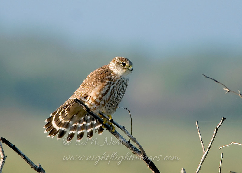 "Merlin © 2009 C. M. Neri.  Laguna Atascosa NWR, TX MERLTX  <div class=""ss-paypal-button""><div class=""ss-paypal-add-to-cart-section""><div class=""ss-paypal-product-options""><h4>Mat Sizes</h4><ul><li><a href=""https://www.paypal.com/cgi-bin/webscr?cmd=_cart&amp;business=T77V5VKCW4K2U&amp;lc=US&amp;item_name=Merlin%20%C2%A9%202009%20C.%20M.%20Neri.%20%20Laguna%20Atascosa%20NWR%2C%20TX%20MERLTX&amp;item_number=http%3A%2F%2Fwww.nightflightimages.com%2FGalleries-1%2FHawks%2Fi-gttqfSP&amp;button_subtype=products&amp;no_note=0&amp;cn=Add%20special%20instructions%20to%20the%20seller%3A&amp;no_shipping=2&amp;currency_code=USD&amp;weight_unit=lbs&amp;add=1&amp;bn=PP-ShopCartBF%3Abtn_cart_SM.gif%3ANonHosted&amp;on0=Mat%20Sizes&amp;option_select0=5%20x%207&amp;option_amount0=10.00&amp;option_select1=8%20x%2010&amp;option_amount1=18.00&amp;option_select2=11%20x%2014&amp;option_amount2=28.00&amp;option_select3=card&amp;option_amount3=4.00&amp;option_index=0&amp;charset=utf-8&amp;submit=&amp;os0=5%20x%207"" target=""paypal""><span>5 x 7 $11.00 USD</span><img src=""https://www.paypalobjects.com/en_US/i/btn/btn_cart_SM.gif""></a></li><li><a href=""https://www.paypal.com/cgi-bin/webscr?cmd=_cart&amp;business=T77V5VKCW4K2U&amp;lc=US&amp;item_name=Merlin%20%C2%A9%202009%20C.%20M.%20Neri.%20%20Laguna%20Atascosa%20NWR%2C%20TX%20MERLTX&amp;item_number=http%3A%2F%2Fwww.nightflightimages.com%2FGalleries-1%2FHawks%2Fi-gttqfSP&amp;button_subtype=products&amp;no_note=0&amp;cn=Add%20special%20instructions%20to%20the%20seller%3A&amp;no_shipping=2&amp;currency_code=USD&amp;weight_unit=lbs&amp;add=1&amp;bn=PP-ShopCartBF%3Abtn_cart_SM.gif%3ANonHosted&amp;on0=Mat%20Sizes&amp;option_select0=5%20x%207&amp;option_amount0=10.00&amp;option_select1=8%20x%2010&amp;option_amount1=18.00&amp;option_select2=11%20x%2014&amp;option_amount2=28.00&amp;option_select3=card&amp;option_amount3=4.00&amp;option_index=0&amp;charset=utf-8&amp;submit=&amp;os0=8%20x%2010"" target=""paypal""><span>8 x 10 $19.00 USD</span><img src=""https://www.paypalobjects.com/en_US/i/btn/btn_cart_SM.gif""></a></li><li><a href=""https://www.paypal.com/cgi-bin/webscr?cmd=_cart&amp;business=T77V5VKCW4K2U&amp;lc=US&amp;item_name=Merlin%20%C2%A9%202009%20C.%20M.%20Neri.%20%20Laguna%20Atascosa%20NWR%2C%20TX%20MERLTX&amp;item_number=http%3A%2F%2Fwww.nightflightimages.com%2FGalleries-1%2FHawks%2Fi-gttqfSP&amp;button_subtype=products&amp;no_note=0&amp;cn=Add%20special%20instructions%20to%20the%20seller%3A&amp;no_shipping=2&amp;currency_code=USD&amp;weight_unit=lbs&amp;add=1&amp;bn=PP-ShopCartBF%3Abtn_cart_SM.gif%3ANonHosted&amp;on0=Mat%20Sizes&amp;option_select0=5%20x%207&amp;option_amount0=10.00&amp;option_select1=8%20x%2010&amp;option_amount1=18.00&amp;option_select2=11%20x%2014&amp;option_amount2=28.00&amp;option_select3=card&amp;option_amount3=4.00&amp;option_index=0&amp;charset=utf-8&amp;submit=&amp;os0=11%20x%2014"" target=""paypal""><span>11 x 14 $29.00 USD</span><img src=""https://www.paypalobjects.com/en_US/i/btn/btn_cart_SM.gif""></a></li><li><a href=""https://www.paypal.com/cgi-bin/webscr?cmd=_cart&amp;business=T77V5VKCW4K2U&amp;lc=US&amp;item_name=Merlin%20%C2%A9%202009%20C.%20M.%20Neri.%20%20Laguna%20Atascosa%20NWR%2C%20TX%20MERLTX&amp;item_number=http%3A%2F%2Fwww.nightflightimages.com%2FGalleries-1%2FHawks%2Fi-gttqfSP&amp;button_subtype=products&amp;no_note=0&amp;cn=Add%20special%20instructions%20to%20the%20seller%3A&amp;no_shipping=2&amp;currency_code=USD&amp;weight_unit=lbs&amp;add=1&amp;bn=PP-ShopCartBF%3Abtn_cart_SM.gif%3ANonHosted&amp;on0=Mat%20Sizes&amp;option_select0=5%20x%207&amp;option_amount0=10.00&amp;option_select1=8%20x%2010&amp;option_amount1=18.00&amp;option_select2=11%20x%2014&amp;option_amount2=28.00&amp;option_select3=card&amp;option_amount3=4.00&amp;option_index=0&amp;charset=utf-8&amp;submit=&amp;os0=card"" target=""paypal""><span>card $5.00 USD</span><img src=""https://www.paypalobjects.com/en_US/i/btn/btn_cart_SM.gif""></a></li></ul></div></div> <div class=""ss-paypal-view-cart-section""><a href=""https://www.paypal.com/cgi-bin/webscr?cmd=_cart&amp;business=T77V5VKCW4K2U&amp;display=1&amp;item_name=Merlin%20%C2%A9%202009%20C.%20M.%20Neri.%20%20Laguna%20Atascosa%20NWR%2C%20TX%20MERLTX&amp;item_number=http%3A%2F%2Fwww.nightflightimages.com%2FGalleries-1%2FHawks%2Fi-gttqfSP&amp;charset=utf-8&amp;submit="" target=""paypal"" class=""ss-paypal-submit-button""><img src=""https://www.paypalobjects.com/en_US/i/btn/btn_viewcart_LG.gif""></a></div></div><div class=""ss-paypal-button-end""></div>"