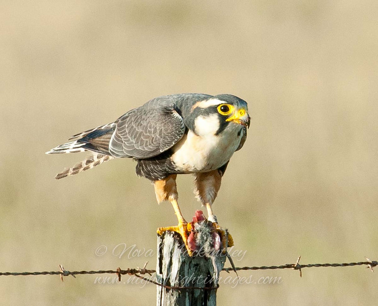 "Aplomado Falcon with rat © 2009 Nova Mackentley Laguna Atascosa NWR, TX AFR  <div class=""ss-paypal-button""><div class=""ss-paypal-add-to-cart-section""><div class=""ss-paypal-product-options""><h4>Mat Sizes</h4><ul><li><a href=""https://www.paypal.com/cgi-bin/webscr?cmd=_cart&amp;business=T77V5VKCW4K2U&amp;lc=US&amp;item_name=Aplomado%20Falcon%20with%20rat%20%C2%A9%202009%20Nova%20Mackentley%20Laguna%20Atascosa%20NWR%2C%20TX%20AFR&amp;item_number=http%3A%2F%2Fwww.nightflightimages.com%2FGalleries-1%2FHawks%2Fi-gwmZZsc&amp;button_subtype=products&amp;no_note=0&amp;cn=Add%20special%20instructions%20to%20the%20seller%3A&amp;no_shipping=2&amp;currency_code=USD&amp;weight_unit=lbs&amp;add=1&amp;bn=PP-ShopCartBF%3Abtn_cart_SM.gif%3ANonHosted&amp;on0=Mat%20Sizes&amp;option_select0=5%20x%207&amp;option_amount0=10.00&amp;option_select1=8%20x%2010&amp;option_amount1=18.00&amp;option_select2=11%20x%2014&amp;option_amount2=28.00&amp;option_select3=card&amp;option_amount3=4.00&amp;option_index=0&amp;charset=utf-8&amp;submit=&amp;os0=5%20x%207"" target=""paypal""><span>5 x 7 $11.00 USD</span><img src=""https://www.paypalobjects.com/en_US/i/btn/btn_cart_SM.gif""></a></li><li><a href=""https://www.paypal.com/cgi-bin/webscr?cmd=_cart&amp;business=T77V5VKCW4K2U&amp;lc=US&amp;item_name=Aplomado%20Falcon%20with%20rat%20%C2%A9%202009%20Nova%20Mackentley%20Laguna%20Atascosa%20NWR%2C%20TX%20AFR&amp;item_number=http%3A%2F%2Fwww.nightflightimages.com%2FGalleries-1%2FHawks%2Fi-gwmZZsc&amp;button_subtype=products&amp;no_note=0&amp;cn=Add%20special%20instructions%20to%20the%20seller%3A&amp;no_shipping=2&amp;currency_code=USD&amp;weight_unit=lbs&amp;add=1&amp;bn=PP-ShopCartBF%3Abtn_cart_SM.gif%3ANonHosted&amp;on0=Mat%20Sizes&amp;option_select0=5%20x%207&amp;option_amount0=10.00&amp;option_select1=8%20x%2010&amp;option_amount1=18.00&amp;option_select2=11%20x%2014&amp;option_amount2=28.00&amp;option_select3=card&amp;option_amount3=4.00&amp;option_index=0&amp;charset=utf-8&amp;submit=&amp;os0=8%20x%2010"" target=""paypal""><span>8 x 10 $19.00 USD</span><img src=""https://www.paypalobjects.com/en_US/i/btn/btn_cart_SM.gif""></a></li><li><a href=""https://www.paypal.com/cgi-bin/webscr?cmd=_cart&amp;business=T77V5VKCW4K2U&amp;lc=US&amp;item_name=Aplomado%20Falcon%20with%20rat%20%C2%A9%202009%20Nova%20Mackentley%20Laguna%20Atascosa%20NWR%2C%20TX%20AFR&amp;item_number=http%3A%2F%2Fwww.nightflightimages.com%2FGalleries-1%2FHawks%2Fi-gwmZZsc&amp;button_subtype=products&amp;no_note=0&amp;cn=Add%20special%20instructions%20to%20the%20seller%3A&amp;no_shipping=2&amp;currency_code=USD&amp;weight_unit=lbs&amp;add=1&amp;bn=PP-ShopCartBF%3Abtn_cart_SM.gif%3ANonHosted&amp;on0=Mat%20Sizes&amp;option_select0=5%20x%207&amp;option_amount0=10.00&amp;option_select1=8%20x%2010&amp;option_amount1=18.00&amp;option_select2=11%20x%2014&amp;option_amount2=28.00&amp;option_select3=card&amp;option_amount3=4.00&amp;option_index=0&amp;charset=utf-8&amp;submit=&amp;os0=11%20x%2014"" target=""paypal""><span>11 x 14 $29.00 USD</span><img src=""https://www.paypalobjects.com/en_US/i/btn/btn_cart_SM.gif""></a></li><li><a href=""https://www.paypal.com/cgi-bin/webscr?cmd=_cart&amp;business=T77V5VKCW4K2U&amp;lc=US&amp;item_name=Aplomado%20Falcon%20with%20rat%20%C2%A9%202009%20Nova%20Mackentley%20Laguna%20Atascosa%20NWR%2C%20TX%20AFR&amp;item_number=http%3A%2F%2Fwww.nightflightimages.com%2FGalleries-1%2FHawks%2Fi-gwmZZsc&amp;button_subtype=products&amp;no_note=0&amp;cn=Add%20special%20instructions%20to%20the%20seller%3A&amp;no_shipping=2&amp;currency_code=USD&amp;weight_unit=lbs&amp;add=1&amp;bn=PP-ShopCartBF%3Abtn_cart_SM.gif%3ANonHosted&amp;on0=Mat%20Sizes&amp;option_select0=5%20x%207&amp;option_amount0=10.00&amp;option_select1=8%20x%2010&amp;option_amount1=18.00&amp;option_select2=11%20x%2014&amp;option_amount2=28.00&amp;option_select3=card&amp;option_amount3=4.00&amp;option_index=0&amp;charset=utf-8&amp;submit=&amp;os0=card"" target=""paypal""><span>card $5.00 USD</span><img src=""https://www.paypalobjects.com/en_US/i/btn/btn_cart_SM.gif""></a></li></ul></div></div> <div class=""ss-paypal-view-cart-section""><a href=""https://www.paypal.com/cgi-bin/webscr?cmd=_cart&amp;business=T77V5VKCW4K2U&amp;display=1&amp;item_name=Aplomado%20Falcon%20with%20rat%20%C2%A9%202009%20Nova%20Mackentley%20Laguna%20Atascosa%20NWR%2C%20TX%20AFR&amp;item_number=http%3A%2F%2Fwww.nightflightimages.com%2FGalleries-1%2FHawks%2Fi-gwmZZsc&amp;charset=utf-8&amp;submit="" target=""paypal"" class=""ss-paypal-submit-button""><img src=""https://www.paypalobjects.com/en_US/i/btn/btn_viewcart_LG.gif""></a></div></div><div class=""ss-paypal-button-end""></div>"