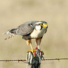 "Aplomado Falcon with rat © 2009 Nova Mackentley Laguna Atascosa NWR, TX AFR  <div class=""ss-paypal-button""><div class=""ss-paypal-add-to-cart-section""><div class=""ss-paypal-product-options""><h4>Mat Sizes</h4><ul><li><a href=""https://www.paypal.com/cgi-bin/webscr?cmd=_cart&business=T77V5VKCW4K2U&lc=US&item_name=Aplomado%20Falcon%20with%20rat%20%C2%A9%202009%20Nova%20Mackentley%20Laguna%20Atascosa%20NWR%2C%20TX%20AFR&item_number=http%3A%2F%2Fwww.nightflightimages.com%2FGalleries-1%2FHawks%2Fi-gwmZZsc&button_subtype=products&no_note=0&cn=Add%20special%20instructions%20to%20the%20seller%3A&no_shipping=2&currency_code=USD&weight_unit=lbs&add=1&bn=PP-ShopCartBF%3Abtn_cart_SM.gif%3ANonHosted&on0=Mat%20Sizes&option_select0=5%20x%207&option_amount0=10.00&option_select1=8%20x%2010&option_amount1=18.00&option_select2=11%20x%2014&option_amount2=28.00&option_select3=card&option_amount3=4.00&option_index=0&charset=utf-8&submit=&os0=5%20x%207"" target=""paypal""><span>5 x 7 $11.00 USD</span><img src=""https://www.paypalobjects.com/en_US/i/btn/btn_cart_SM.gif""></a></li><li><a href=""https://www.paypal.com/cgi-bin/webscr?cmd=_cart&business=T77V5VKCW4K2U&lc=US&item_name=Aplomado%20Falcon%20with%20rat%20%C2%A9%202009%20Nova%20Mackentley%20Laguna%20Atascosa%20NWR%2C%20TX%20AFR&item_number=http%3A%2F%2Fwww.nightflightimages.com%2FGalleries-1%2FHawks%2Fi-gwmZZsc&button_subtype=products&no_note=0&cn=Add%20special%20instructions%20to%20the%20seller%3A&no_shipping=2&currency_code=USD&weight_unit=lbs&add=1&bn=PP-ShopCartBF%3Abtn_cart_SM.gif%3ANonHosted&on0=Mat%20Sizes&option_select0=5%20x%207&option_amount0=10.00&option_select1=8%20x%2010&option_amount1=18.00&option_select2=11%20x%2014&option_amount2=28.00&option_select3=card&option_amount3=4.00&option_index=0&charset=utf-8&submit=&os0=8%20x%2010"" target=""paypal""><span>8 x 10 $19.00 USD</span><img src=""https://www.paypalobjects.com/en_US/i/btn/btn_cart_SM.gif""></a></li><li><a href=""https://www.paypal.com/cgi-bin/webscr?cmd=_cart&business=T77V5VKCW4K2U&lc=US&item_name=Aplomado%20Falcon%20with%20rat%20%C2%A9%202009%20Nova%20Mackentley%20Laguna%20Atascosa%20NWR%2C%20TX%20AFR&item_number=http%3A%2F%2Fwww.nightflightimages.com%2FGalleries-1%2FHawks%2Fi-gwmZZsc&button_subtype=products&no_note=0&cn=Add%20special%20instructions%20to%20the%20seller%3A&no_shipping=2&currency_code=USD&weight_unit=lbs&add=1&bn=PP-ShopCartBF%3Abtn_cart_SM.gif%3ANonHosted&on0=Mat%20Sizes&option_select0=5%20x%207&option_amount0=10.00&option_select1=8%20x%2010&option_amount1=18.00&option_select2=11%20x%2014&option_amount2=28.00&option_select3=card&option_amount3=4.00&option_index=0&charset=utf-8&submit=&os0=11%20x%2014"" target=""paypal""><span>11 x 14 $29.00 USD</span><img src=""https://www.paypalobjects.com/en_US/i/btn/btn_cart_SM.gif""></a></li><li><a href=""https://www.paypal.com/cgi-bin/webscr?cmd=_cart&business=T77V5VKCW4K2U&lc=US&item_name=Aplomado%20Falcon%20with%20rat%20%C2%A9%202009%20Nova%20Mackentley%20Laguna%20Atascosa%20NWR%2C%20TX%20AFR&item_number=http%3A%2F%2Fwww.nightflightimages.com%2FGalleries-1%2FHawks%2Fi-gwmZZsc&button_subtype=products&no_note=0&cn=Add%20special%20instructions%20to%20the%20seller%3A&no_shipping=2&currency_code=USD&weight_unit=lbs&add=1&bn=PP-ShopCartBF%3Abtn_cart_SM.gif%3ANonHosted&on0=Mat%20Sizes&option_select0=5%20x%207&option_amount0=10.00&option_select1=8%20x%2010&option_amount1=18.00&option_select2=11%20x%2014&option_amount2=28.00&option_select3=card&option_amount3=4.00&option_index=0&charset=utf-8&submit=&os0=card"" target=""paypal""><span>card $5.00 USD</span><img src=""https://www.paypalobjects.com/en_US/i/btn/btn_cart_SM.gif""></a></li></ul></div></div> <div class=""ss-paypal-view-cart-section""><a href=""https://www.paypal.com/cgi-bin/webscr?cmd=_cart&business=T77V5VKCW4K2U&display=1&item_name=Aplomado%20Falcon%20with%20rat%20%C2%A9%202009%20Nova%20Mackentley%20Laguna%20Atascosa%20NWR%2C%20TX%20AFR&item_number=http%3A%2F%2Fwww.nightflightimages.com%2FGalleries-1%2FHawks%2Fi-gwmZZsc&charset=utf-8&submit="" target=""paypal"" class=""ss-paypal-submit-button""><img src=""https://www.paypalobjects.com/en_US/i/btn/btn_viewcart_LG.gif""></a></div></div><div class=""ss-paypal-button-end""></div>"