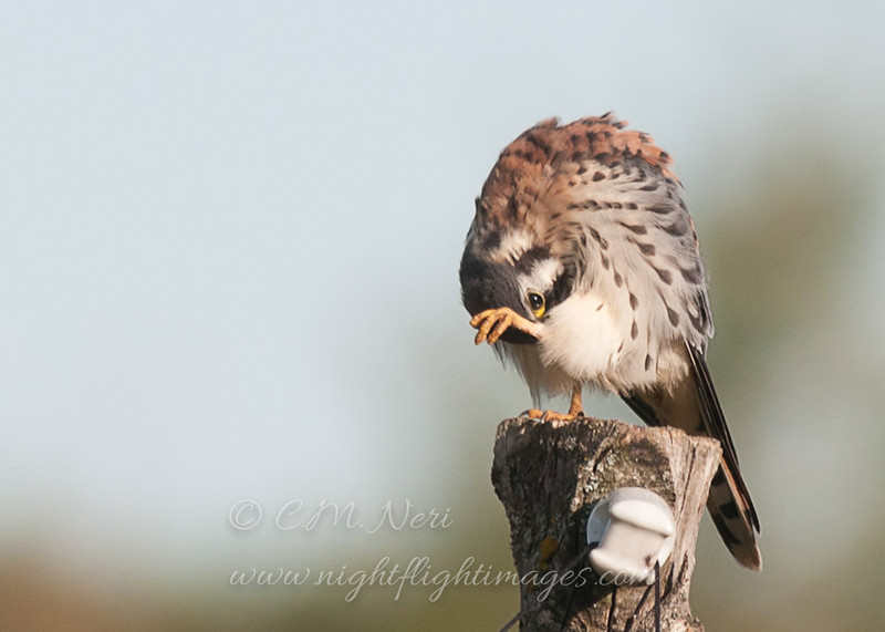 "American Kestrel preening © 2013 C. M. Neri.  Hawk Ridge, MN AMKEHRPR  <div class=""ss-paypal-button""><div class=""ss-paypal-add-to-cart-section""><div class=""ss-paypal-product-options""><h4>Mat Sizes</h4><ul><li><a href=""https://www.paypal.com/cgi-bin/webscr?cmd=_cart&amp;business=T77V5VKCW4K2U&amp;lc=US&amp;item_name=American%20Kestrel%20preening%20%C2%A9%202013%20C.%20M.%20Neri.%20%20Hawk%20Ridge%2C%20MN%20AMKEHRPR&amp;item_number=http%3A%2F%2Fwww.nightflightimages.com%2FGalleries-1%2FHawks%2Fi-htTkNR5&amp;button_subtype=products&amp;no_note=0&amp;cn=Add%20special%20instructions%20to%20the%20seller%3A&amp;no_shipping=2&amp;currency_code=USD&amp;weight_unit=lbs&amp;add=1&amp;bn=PP-ShopCartBF%3Abtn_cart_SM.gif%3ANonHosted&amp;on0=Mat%20Sizes&amp;option_select0=5%20x%207&amp;option_amount0=10.00&amp;option_select1=8%20x%2010&amp;option_amount1=18.00&amp;option_select2=11%20x%2014&amp;option_amount2=28.00&amp;option_select3=card&amp;option_amount3=4.00&amp;option_index=0&amp;charset=utf-8&amp;submit=&amp;os0=5%20x%207"" target=""paypal""><span>5 x 7 $11.00 USD</span><img src=""https://www.paypalobjects.com/en_US/i/btn/btn_cart_SM.gif""></a></li><li><a href=""https://www.paypal.com/cgi-bin/webscr?cmd=_cart&amp;business=T77V5VKCW4K2U&amp;lc=US&amp;item_name=American%20Kestrel%20preening%20%C2%A9%202013%20C.%20M.%20Neri.%20%20Hawk%20Ridge%2C%20MN%20AMKEHRPR&amp;item_number=http%3A%2F%2Fwww.nightflightimages.com%2FGalleries-1%2FHawks%2Fi-htTkNR5&amp;button_subtype=products&amp;no_note=0&amp;cn=Add%20special%20instructions%20to%20the%20seller%3A&amp;no_shipping=2&amp;currency_code=USD&amp;weight_unit=lbs&amp;add=1&amp;bn=PP-ShopCartBF%3Abtn_cart_SM.gif%3ANonHosted&amp;on0=Mat%20Sizes&amp;option_select0=5%20x%207&amp;option_amount0=10.00&amp;option_select1=8%20x%2010&amp;option_amount1=18.00&amp;option_select2=11%20x%2014&amp;option_amount2=28.00&amp;option_select3=card&amp;option_amount3=4.00&amp;option_index=0&amp;charset=utf-8&amp;submit=&amp;os0=8%20x%2010"" target=""paypal""><span>8 x 10 $19.00 USD</span><img src=""https://www.paypalobjects.com/en_US/i/btn/btn_cart_SM.gif""></a></li><li><a href=""https://www.paypal.com/cgi-bin/webscr?cmd=_cart&amp;business=T77V5VKCW4K2U&amp;lc=US&amp;item_name=American%20Kestrel%20preening%20%C2%A9%202013%20C.%20M.%20Neri.%20%20Hawk%20Ridge%2C%20MN%20AMKEHRPR&amp;item_number=http%3A%2F%2Fwww.nightflightimages.com%2FGalleries-1%2FHawks%2Fi-htTkNR5&amp;button_subtype=products&amp;no_note=0&amp;cn=Add%20special%20instructions%20to%20the%20seller%3A&amp;no_shipping=2&amp;currency_code=USD&amp;weight_unit=lbs&amp;add=1&amp;bn=PP-ShopCartBF%3Abtn_cart_SM.gif%3ANonHosted&amp;on0=Mat%20Sizes&amp;option_select0=5%20x%207&amp;option_amount0=10.00&amp;option_select1=8%20x%2010&amp;option_amount1=18.00&amp;option_select2=11%20x%2014&amp;option_amount2=28.00&amp;option_select3=card&amp;option_amount3=4.00&amp;option_index=0&amp;charset=utf-8&amp;submit=&amp;os0=11%20x%2014"" target=""paypal""><span>11 x 14 $29.00 USD</span><img src=""https://www.paypalobjects.com/en_US/i/btn/btn_cart_SM.gif""></a></li><li><a href=""https://www.paypal.com/cgi-bin/webscr?cmd=_cart&amp;business=T77V5VKCW4K2U&amp;lc=US&amp;item_name=American%20Kestrel%20preening%20%C2%A9%202013%20C.%20M.%20Neri.%20%20Hawk%20Ridge%2C%20MN%20AMKEHRPR&amp;item_number=http%3A%2F%2Fwww.nightflightimages.com%2FGalleries-1%2FHawks%2Fi-htTkNR5&amp;button_subtype=products&amp;no_note=0&amp;cn=Add%20special%20instructions%20to%20the%20seller%3A&amp;no_shipping=2&amp;currency_code=USD&amp;weight_unit=lbs&amp;add=1&amp;bn=PP-ShopCartBF%3Abtn_cart_SM.gif%3ANonHosted&amp;on0=Mat%20Sizes&amp;option_select0=5%20x%207&amp;option_amount0=10.00&amp;option_select1=8%20x%2010&amp;option_amount1=18.00&amp;option_select2=11%20x%2014&amp;option_amount2=28.00&amp;option_select3=card&amp;option_amount3=4.00&amp;option_index=0&amp;charset=utf-8&amp;submit=&amp;os0=card"" target=""paypal""><span>card $5.00 USD</span><img src=""https://www.paypalobjects.com/en_US/i/btn/btn_cart_SM.gif""></a></li></ul></div></div> <div class=""ss-paypal-view-cart-section""><a href=""https://www.paypal.com/cgi-bin/webscr?cmd=_cart&amp;business=T77V5VKCW4K2U&amp;display=1&amp;item_name=American%20Kestrel%20preening%20%C2%A9%202013%20C.%20M.%20Neri.%20%20Hawk%20Ridge%2C%20MN%20AMKEHRPR&amp;item_number=http%3A%2F%2Fwww.nightflightimages.com%2FGalleries-1%2FHawks%2Fi-htTkNR5&amp;charset=utf-8&amp;submit="" target=""paypal"" class=""ss-paypal-submit-button""><img src=""https://www.paypalobjects.com/en_US/i/btn/btn_viewcart_LG.gif""></a></div></div><div class=""ss-paypal-button-end""></div>"