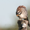 "American Kestrel preening © 2013 C. M. Neri.  Hawk Ridge, MN AMKEHRPR  <div class=""ss-paypal-button""><div class=""ss-paypal-add-to-cart-section""><div class=""ss-paypal-product-options""><h4>Mat Sizes</h4><ul><li><a href=""https://www.paypal.com/cgi-bin/webscr?cmd=_cart&business=T77V5VKCW4K2U&lc=US&item_name=American%20Kestrel%20preening%20%C2%A9%202013%20C.%20M.%20Neri.%20%20Hawk%20Ridge%2C%20MN%20AMKEHRPR&item_number=http%3A%2F%2Fwww.nightflightimages.com%2FGalleries-1%2FHawks%2Fi-htTkNR5&button_subtype=products&no_note=0&cn=Add%20special%20instructions%20to%20the%20seller%3A&no_shipping=2&currency_code=USD&weight_unit=lbs&add=1&bn=PP-ShopCartBF%3Abtn_cart_SM.gif%3ANonHosted&on0=Mat%20Sizes&option_select0=5%20x%207&option_amount0=10.00&option_select1=8%20x%2010&option_amount1=18.00&option_select2=11%20x%2014&option_amount2=28.00&option_select3=card&option_amount3=4.00&option_index=0&charset=utf-8&submit=&os0=5%20x%207"" target=""paypal""><span>5 x 7 $11.00 USD</span><img src=""https://www.paypalobjects.com/en_US/i/btn/btn_cart_SM.gif""></a></li><li><a href=""https://www.paypal.com/cgi-bin/webscr?cmd=_cart&business=T77V5VKCW4K2U&lc=US&item_name=American%20Kestrel%20preening%20%C2%A9%202013%20C.%20M.%20Neri.%20%20Hawk%20Ridge%2C%20MN%20AMKEHRPR&item_number=http%3A%2F%2Fwww.nightflightimages.com%2FGalleries-1%2FHawks%2Fi-htTkNR5&button_subtype=products&no_note=0&cn=Add%20special%20instructions%20to%20the%20seller%3A&no_shipping=2&currency_code=USD&weight_unit=lbs&add=1&bn=PP-ShopCartBF%3Abtn_cart_SM.gif%3ANonHosted&on0=Mat%20Sizes&option_select0=5%20x%207&option_amount0=10.00&option_select1=8%20x%2010&option_amount1=18.00&option_select2=11%20x%2014&option_amount2=28.00&option_select3=card&option_amount3=4.00&option_index=0&charset=utf-8&submit=&os0=8%20x%2010"" target=""paypal""><span>8 x 10 $19.00 USD</span><img src=""https://www.paypalobjects.com/en_US/i/btn/btn_cart_SM.gif""></a></li><li><a href=""https://www.paypal.com/cgi-bin/webscr?cmd=_cart&business=T77V5VKCW4K2U&lc=US&item_name=American%20Kestrel%20preening%20%C2%A9%202013%20C.%20M.%20Neri.%20%20Hawk%20Ridge%2C%20MN%20AMKEHRPR&item_number=http%3A%2F%2Fwww.nightflightimages.com%2FGalleries-1%2FHawks%2Fi-htTkNR5&button_subtype=products&no_note=0&cn=Add%20special%20instructions%20to%20the%20seller%3A&no_shipping=2&currency_code=USD&weight_unit=lbs&add=1&bn=PP-ShopCartBF%3Abtn_cart_SM.gif%3ANonHosted&on0=Mat%20Sizes&option_select0=5%20x%207&option_amount0=10.00&option_select1=8%20x%2010&option_amount1=18.00&option_select2=11%20x%2014&option_amount2=28.00&option_select3=card&option_amount3=4.00&option_index=0&charset=utf-8&submit=&os0=11%20x%2014"" target=""paypal""><span>11 x 14 $29.00 USD</span><img src=""https://www.paypalobjects.com/en_US/i/btn/btn_cart_SM.gif""></a></li><li><a href=""https://www.paypal.com/cgi-bin/webscr?cmd=_cart&business=T77V5VKCW4K2U&lc=US&item_name=American%20Kestrel%20preening%20%C2%A9%202013%20C.%20M.%20Neri.%20%20Hawk%20Ridge%2C%20MN%20AMKEHRPR&item_number=http%3A%2F%2Fwww.nightflightimages.com%2FGalleries-1%2FHawks%2Fi-htTkNR5&button_subtype=products&no_note=0&cn=Add%20special%20instructions%20to%20the%20seller%3A&no_shipping=2&currency_code=USD&weight_unit=lbs&add=1&bn=PP-ShopCartBF%3Abtn_cart_SM.gif%3ANonHosted&on0=Mat%20Sizes&option_select0=5%20x%207&option_amount0=10.00&option_select1=8%20x%2010&option_amount1=18.00&option_select2=11%20x%2014&option_amount2=28.00&option_select3=card&option_amount3=4.00&option_index=0&charset=utf-8&submit=&os0=card"" target=""paypal""><span>card $5.00 USD</span><img src=""https://www.paypalobjects.com/en_US/i/btn/btn_cart_SM.gif""></a></li></ul></div></div> <div class=""ss-paypal-view-cart-section""><a href=""https://www.paypal.com/cgi-bin/webscr?cmd=_cart&business=T77V5VKCW4K2U&display=1&item_name=American%20Kestrel%20preening%20%C2%A9%202013%20C.%20M.%20Neri.%20%20Hawk%20Ridge%2C%20MN%20AMKEHRPR&item_number=http%3A%2F%2Fwww.nightflightimages.com%2FGalleries-1%2FHawks%2Fi-htTkNR5&charset=utf-8&submit="" target=""paypal"" class=""ss-paypal-submit-button""><img src=""https://www.paypalobjects.com/en_US/i/btn/btn_viewcart_LG.gif""></a></div></div><div class=""ss-paypal-button-end""></div>"