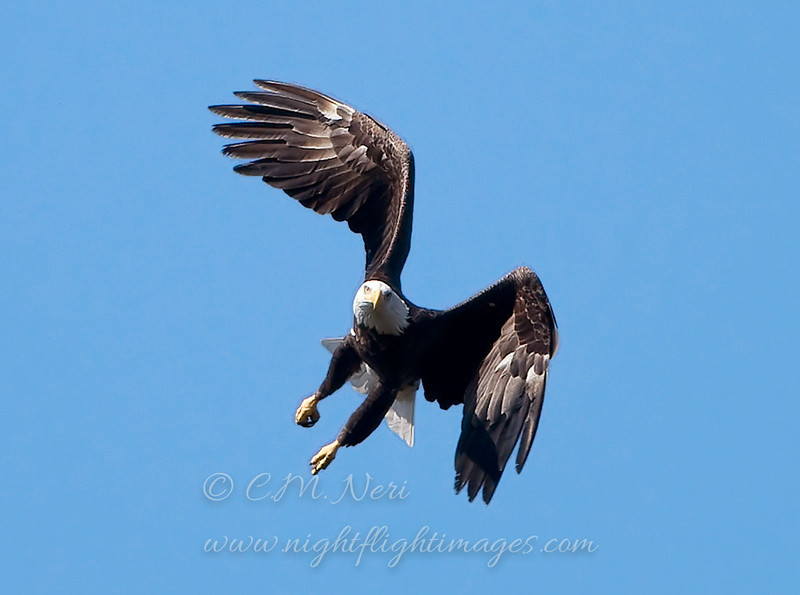 "Bald Eagle © 2008 C. M. Neri.  Whitefish Point, MI BAEA08  <div class=""ss-paypal-button""><div class=""ss-paypal-add-to-cart-section""><div class=""ss-paypal-product-options""><h4>Mat Sizes</h4><ul><li><a href=""https://www.paypal.com/cgi-bin/webscr?cmd=_cart&business=T77V5VKCW4K2U&lc=US&item_name=Bald%20Eagle%20%C2%A9%202008%20C.%20M.%20Neri.%20%20Whitefish%20Point%2C%20MI%20BAEA08&item_number=http%3A%2F%2Fwww.nightflightimages.com%2FGalleries-1%2FHawks%2Fi-jDL2Rgh&button_subtype=products&no_note=0&cn=Add%20special%20instructions%20to%20the%20seller%3A&no_shipping=2&currency_code=USD&weight_unit=lbs&add=1&bn=PP-ShopCartBF%3Abtn_cart_SM.gif%3ANonHosted&on0=Mat%20Sizes&option_select0=5%20x%207&option_amount0=10.00&option_select1=8%20x%2010&option_amount1=18.00&option_select2=11%20x%2014&option_amount2=28.00&option_select3=card&option_amount3=4.00&option_index=0&charset=utf-8&submit=&os0=5%20x%207"" target=""paypal""><span>5 x 7 $11.00 USD</span><img src=""https://www.paypalobjects.com/en_US/i/btn/btn_cart_SM.gif""></a></li><li><a href=""https://www.paypal.com/cgi-bin/webscr?cmd=_cart&business=T77V5VKCW4K2U&lc=US&item_name=Bald%20Eagle%20%C2%A9%202008%20C.%20M.%20Neri.%20%20Whitefish%20Point%2C%20MI%20BAEA08&item_number=http%3A%2F%2Fwww.nightflightimages.com%2FGalleries-1%2FHawks%2Fi-jDL2Rgh&button_subtype=products&no_note=0&cn=Add%20special%20instructions%20to%20the%20seller%3A&no_shipping=2&currency_code=USD&weight_unit=lbs&add=1&bn=PP-ShopCartBF%3Abtn_cart_SM.gif%3ANonHosted&on0=Mat%20Sizes&option_select0=5%20x%207&option_amount0=10.00&option_select1=8%20x%2010&option_amount1=18.00&option_select2=11%20x%2014&option_amount2=28.00&option_select3=card&option_amount3=4.00&option_index=0&charset=utf-8&submit=&os0=8%20x%2010"" target=""paypal""><span>8 x 10 $19.00 USD</span><img src=""https://www.paypalobjects.com/en_US/i/btn/btn_cart_SM.gif""></a></li><li><a href=""https://www.paypal.com/cgi-bin/webscr?cmd=_cart&business=T77V5VKCW4K2U&lc=US&item_name=Bald%20Eagle%20%C2%A9%202008%20C.%20M.%20Neri.%20%20Whitefish%20Point%2C%20MI%20BAEA08&item_number=http%3A%2F%2Fwww.nightflightimages.com%2FGalleries-1%2FHawks%2Fi-jDL2Rgh&button_subtype=products&no_note=0&cn=Add%20special%20instructions%20to%20the%20seller%3A&no_shipping=2&currency_code=USD&weight_unit=lbs&add=1&bn=PP-ShopCartBF%3Abtn_cart_SM.gif%3ANonHosted&on0=Mat%20Sizes&option_select0=5%20x%207&option_amount0=10.00&option_select1=8%20x%2010&option_amount1=18.00&option_select2=11%20x%2014&option_amount2=28.00&option_select3=card&option_amount3=4.00&option_index=0&charset=utf-8&submit=&os0=11%20x%2014"" target=""paypal""><span>11 x 14 $29.00 USD</span><img src=""https://www.paypalobjects.com/en_US/i/btn/btn_cart_SM.gif""></a></li><li><a href=""https://www.paypal.com/cgi-bin/webscr?cmd=_cart&business=T77V5VKCW4K2U&lc=US&item_name=Bald%20Eagle%20%C2%A9%202008%20C.%20M.%20Neri.%20%20Whitefish%20Point%2C%20MI%20BAEA08&item_number=http%3A%2F%2Fwww.nightflightimages.com%2FGalleries-1%2FHawks%2Fi-jDL2Rgh&button_subtype=products&no_note=0&cn=Add%20special%20instructions%20to%20the%20seller%3A&no_shipping=2&currency_code=USD&weight_unit=lbs&add=1&bn=PP-ShopCartBF%3Abtn_cart_SM.gif%3ANonHosted&on0=Mat%20Sizes&option_select0=5%20x%207&option_amount0=10.00&option_select1=8%20x%2010&option_amount1=18.00&option_select2=11%20x%2014&option_amount2=28.00&option_select3=card&option_amount3=4.00&option_index=0&charset=utf-8&submit=&os0=card"" target=""paypal""><span>card $5.00 USD</span><img src=""https://www.paypalobjects.com/en_US/i/btn/btn_cart_SM.gif""></a></li></ul></div></div> <div class=""ss-paypal-view-cart-section""><a href=""https://www.paypal.com/cgi-bin/webscr?cmd=_cart&business=T77V5VKCW4K2U&display=1&item_name=Bald%20Eagle%20%C2%A9%202008%20C.%20M.%20Neri.%20%20Whitefish%20Point%2C%20MI%20BAEA08&item_number=http%3A%2F%2Fwww.nightflightimages.com%2FGalleries-1%2FHawks%2Fi-jDL2Rgh&charset=utf-8&submit="" target=""paypal"" class=""ss-paypal-submit-button""><img src=""https://www.paypalobjects.com/en_US/i/btn/btn_viewcart_LG.gif""></a></div></div><div class=""ss-paypal-button-end""></div>"
