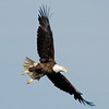 "Bald Eagle © 2007 Nova Mackentley Tahquamenon Rivermouth, MI BEA  <div class=""ss-paypal-button""><div class=""ss-paypal-add-to-cart-section""><div class=""ss-paypal-product-options""><h4>Mat Sizes</h4><ul><li><a href=""https://www.paypal.com/cgi-bin/webscr?cmd=_cart&amp;business=T77V5VKCW4K2U&amp;lc=US&amp;item_name=Bald%20Eagle%20%C2%A9%202007%20Nova%20Mackentley%20Tahquamenon%20Rivermouth%2C%20MI%20BEA&amp;item_number=http%3A%2F%2Fwww.nightflightimages.com%2FGalleries-1%2FHawks%2Fi-kKcFLw3&amp;button_subtype=products&amp;no_note=0&amp;cn=Add%20special%20instructions%20to%20the%20seller%3A&amp;no_shipping=2&amp;currency_code=USD&amp;weight_unit=lbs&amp;add=1&amp;bn=PP-ShopCartBF%3Abtn_cart_SM.gif%3ANonHosted&amp;on0=Mat%20Sizes&amp;option_select0=5%20x%207&amp;option_amount0=10.00&amp;option_select1=8%20x%2010&amp;option_amount1=18.00&amp;option_select2=11%20x%2014&amp;option_amount2=28.00&amp;option_select3=card&amp;option_amount3=4.00&amp;option_index=0&amp;charset=utf-8&amp;submit=&amp;os0=5%20x%207"" target=""paypal""><span>5 x 7 $11.00 USD</span><img src=""https://www.paypalobjects.com/en_US/i/btn/btn_cart_SM.gif""></a></li><li><a href=""https://www.paypal.com/cgi-bin/webscr?cmd=_cart&amp;business=T77V5VKCW4K2U&amp;lc=US&amp;item_name=Bald%20Eagle%20%C2%A9%202007%20Nova%20Mackentley%20Tahquamenon%20Rivermouth%2C%20MI%20BEA&amp;item_number=http%3A%2F%2Fwww.nightflightimages.com%2FGalleries-1%2FHawks%2Fi-kKcFLw3&amp;button_subtype=products&amp;no_note=0&amp;cn=Add%20special%20instructions%20to%20the%20seller%3A&amp;no_shipping=2&amp;currency_code=USD&amp;weight_unit=lbs&amp;add=1&amp;bn=PP-ShopCartBF%3Abtn_cart_SM.gif%3ANonHosted&amp;on0=Mat%20Sizes&amp;option_select0=5%20x%207&amp;option_amount0=10.00&amp;option_select1=8%20x%2010&amp;option_amount1=18.00&amp;option_select2=11%20x%2014&amp;option_amount2=28.00&amp;option_select3=card&amp;option_amount3=4.00&amp;option_index=0&amp;charset=utf-8&amp;submit=&amp;os0=8%20x%2010"" target=""paypal""><span>8 x 10 $19.00 USD</span><img src=""https://www.paypalobjects.com/en_US/i/btn/btn_cart_SM.gif""></a></li><li><a href=""https://www.paypal.com/cgi-bin/webscr?cmd=_cart&amp;business=T77V5VKCW4K2U&amp;lc=US&amp;item_name=Bald%20Eagle%20%C2%A9%202007%20Nova%20Mackentley%20Tahquamenon%20Rivermouth%2C%20MI%20BEA&amp;item_number=http%3A%2F%2Fwww.nightflightimages.com%2FGalleries-1%2FHawks%2Fi-kKcFLw3&amp;button_subtype=products&amp;no_note=0&amp;cn=Add%20special%20instructions%20to%20the%20seller%3A&amp;no_shipping=2&amp;currency_code=USD&amp;weight_unit=lbs&amp;add=1&amp;bn=PP-ShopCartBF%3Abtn_cart_SM.gif%3ANonHosted&amp;on0=Mat%20Sizes&amp;option_select0=5%20x%207&amp;option_amount0=10.00&amp;option_select1=8%20x%2010&amp;option_amount1=18.00&amp;option_select2=11%20x%2014&amp;option_amount2=28.00&amp;option_select3=card&amp;option_amount3=4.00&amp;option_index=0&amp;charset=utf-8&amp;submit=&amp;os0=11%20x%2014"" target=""paypal""><span>11 x 14 $29.00 USD</span><img src=""https://www.paypalobjects.com/en_US/i/btn/btn_cart_SM.gif""></a></li><li><a href=""https://www.paypal.com/cgi-bin/webscr?cmd=_cart&amp;business=T77V5VKCW4K2U&amp;lc=US&amp;item_name=Bald%20Eagle%20%C2%A9%202007%20Nova%20Mackentley%20Tahquamenon%20Rivermouth%2C%20MI%20BEA&amp;item_number=http%3A%2F%2Fwww.nightflightimages.com%2FGalleries-1%2FHawks%2Fi-kKcFLw3&amp;button_subtype=products&amp;no_note=0&amp;cn=Add%20special%20instructions%20to%20the%20seller%3A&amp;no_shipping=2&amp;currency_code=USD&amp;weight_unit=lbs&amp;add=1&amp;bn=PP-ShopCartBF%3Abtn_cart_SM.gif%3ANonHosted&amp;on0=Mat%20Sizes&amp;option_select0=5%20x%207&amp;option_amount0=10.00&amp;option_select1=8%20x%2010&amp;option_amount1=18.00&amp;option_select2=11%20x%2014&amp;option_amount2=28.00&amp;option_select3=card&amp;option_amount3=4.00&amp;option_index=0&amp;charset=utf-8&amp;submit=&amp;os0=card"" target=""paypal""><span>card $5.00 USD</span><img src=""https://www.paypalobjects.com/en_US/i/btn/btn_cart_SM.gif""></a></li></ul></div></div> <div class=""ss-paypal-view-cart-section""><a href=""https://www.paypal.com/cgi-bin/webscr?cmd=_cart&amp;business=T77V5VKCW4K2U&amp;display=1&amp;item_name=Bald%20Eagle%20%C2%A9%202007%20Nova%20Mackentley%20Tahquamenon%20Rivermouth%2C%20MI%20BEA&amp;item_number=http%3A%2F%2Fwww.nightflightimages.com%2FGalleries-1%2FHawks%2Fi-kKcFLw3&amp;charset=utf-8&amp;submit="" target=""paypal"" class=""ss-paypal-submit-button""><img src=""https://www.paypalobjects.com/en_US/i/btn/btn_viewcart_LG.gif""></a></div></div><div class=""ss-paypal-button-end""></div>"