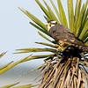 "Aplomado Falcon © 2009 C. M. Neri.  Laguna Atascosa NWR, TX APFA  <div class=""ss-paypal-button""><div class=""ss-paypal-add-to-cart-section""><div class=""ss-paypal-product-options""><h4>Mat Sizes</h4><ul><li><a href=""https://www.paypal.com/cgi-bin/webscr?cmd=_cart&business=T77V5VKCW4K2U&lc=US&item_name=Aplomado%20Falcon%20%C2%A9%202009%20C.%20M.%20Neri.%20%20Laguna%20Atascosa%20NWR%2C%20TX%20APFA&item_number=http%3A%2F%2Fwww.nightflightimages.com%2FGalleries-1%2FHawks%2Fi-kPHvM9s&button_subtype=products&no_note=0&cn=Add%20special%20instructions%20to%20the%20seller%3A&no_shipping=2&currency_code=USD&weight_unit=lbs&add=1&bn=PP-ShopCartBF%3Abtn_cart_SM.gif%3ANonHosted&on0=Mat%20Sizes&option_select0=5%20x%207&option_amount0=10.00&option_select1=8%20x%2010&option_amount1=18.00&option_select2=11%20x%2014&option_amount2=28.00&option_select3=card&option_amount3=4.00&option_index=0&charset=utf-8&submit=&os0=5%20x%207"" target=""paypal""><span>5 x 7 $11.00 USD</span><img src=""https://www.paypalobjects.com/en_US/i/btn/btn_cart_SM.gif""></a></li><li><a href=""https://www.paypal.com/cgi-bin/webscr?cmd=_cart&business=T77V5VKCW4K2U&lc=US&item_name=Aplomado%20Falcon%20%C2%A9%202009%20C.%20M.%20Neri.%20%20Laguna%20Atascosa%20NWR%2C%20TX%20APFA&item_number=http%3A%2F%2Fwww.nightflightimages.com%2FGalleries-1%2FHawks%2Fi-kPHvM9s&button_subtype=products&no_note=0&cn=Add%20special%20instructions%20to%20the%20seller%3A&no_shipping=2&currency_code=USD&weight_unit=lbs&add=1&bn=PP-ShopCartBF%3Abtn_cart_SM.gif%3ANonHosted&on0=Mat%20Sizes&option_select0=5%20x%207&option_amount0=10.00&option_select1=8%20x%2010&option_amount1=18.00&option_select2=11%20x%2014&option_amount2=28.00&option_select3=card&option_amount3=4.00&option_index=0&charset=utf-8&submit=&os0=8%20x%2010"" target=""paypal""><span>8 x 10 $19.00 USD</span><img src=""https://www.paypalobjects.com/en_US/i/btn/btn_cart_SM.gif""></a></li><li><a href=""https://www.paypal.com/cgi-bin/webscr?cmd=_cart&business=T77V5VKCW4K2U&lc=US&item_name=Aplomado%20Falcon%20%C2%A9%202009%20C.%20M.%20Neri.%20%20Laguna%20Atascosa%20NWR%2C%20TX%20APFA&item_number=http%3A%2F%2Fwww.nightflightimages.com%2FGalleries-1%2FHawks%2Fi-kPHvM9s&button_subtype=products&no_note=0&cn=Add%20special%20instructions%20to%20the%20seller%3A&no_shipping=2&currency_code=USD&weight_unit=lbs&add=1&bn=PP-ShopCartBF%3Abtn_cart_SM.gif%3ANonHosted&on0=Mat%20Sizes&option_select0=5%20x%207&option_amount0=10.00&option_select1=8%20x%2010&option_amount1=18.00&option_select2=11%20x%2014&option_amount2=28.00&option_select3=card&option_amount3=4.00&option_index=0&charset=utf-8&submit=&os0=11%20x%2014"" target=""paypal""><span>11 x 14 $29.00 USD</span><img src=""https://www.paypalobjects.com/en_US/i/btn/btn_cart_SM.gif""></a></li><li><a href=""https://www.paypal.com/cgi-bin/webscr?cmd=_cart&business=T77V5VKCW4K2U&lc=US&item_name=Aplomado%20Falcon%20%C2%A9%202009%20C.%20M.%20Neri.%20%20Laguna%20Atascosa%20NWR%2C%20TX%20APFA&item_number=http%3A%2F%2Fwww.nightflightimages.com%2FGalleries-1%2FHawks%2Fi-kPHvM9s&button_subtype=products&no_note=0&cn=Add%20special%20instructions%20to%20the%20seller%3A&no_shipping=2&currency_code=USD&weight_unit=lbs&add=1&bn=PP-ShopCartBF%3Abtn_cart_SM.gif%3ANonHosted&on0=Mat%20Sizes&option_select0=5%20x%207&option_amount0=10.00&option_select1=8%20x%2010&option_amount1=18.00&option_select2=11%20x%2014&option_amount2=28.00&option_select3=card&option_amount3=4.00&option_index=0&charset=utf-8&submit=&os0=card"" target=""paypal""><span>card $5.00 USD</span><img src=""https://www.paypalobjects.com/en_US/i/btn/btn_cart_SM.gif""></a></li></ul></div></div> <div class=""ss-paypal-view-cart-section""><a href=""https://www.paypal.com/cgi-bin/webscr?cmd=_cart&business=T77V5VKCW4K2U&display=1&item_name=Aplomado%20Falcon%20%C2%A9%202009%20C.%20M.%20Neri.%20%20Laguna%20Atascosa%20NWR%2C%20TX%20APFA&item_number=http%3A%2F%2Fwww.nightflightimages.com%2FGalleries-1%2FHawks%2Fi-kPHvM9s&charset=utf-8&submit="" target=""paypal"" class=""ss-paypal-submit-button""><img src=""https://www.paypalobjects.com/en_US/i/btn/btn_viewcart_LG.gif""></a></div></div><div class=""ss-paypal-button-end""></div>"