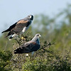 "White-tailed Hawks © 2009 C. M. Neri.  Laguna Atascosa NWR, TX WTHAPAIR  <div class=""ss-paypal-button""><div class=""ss-paypal-add-to-cart-section""><div class=""ss-paypal-product-options""><h4>Mat Sizes</h4><ul><li><a href=""https://www.paypal.com/cgi-bin/webscr?cmd=_cart&amp;business=T77V5VKCW4K2U&amp;lc=US&amp;item_name=White-tailed%20Hawks%20%C2%A9%202009%20C.%20M.%20Neri.%20%20Laguna%20Atascosa%20NWR%2C%20TX%20WTHAPAIR&amp;item_number=http%3A%2F%2Fwww.nightflightimages.com%2FGalleries-1%2FHawks%2Fi-kVrWB3R&amp;button_subtype=products&amp;no_note=0&amp;cn=Add%20special%20instructions%20to%20the%20seller%3A&amp;no_shipping=2&amp;currency_code=USD&amp;weight_unit=lbs&amp;add=1&amp;bn=PP-ShopCartBF%3Abtn_cart_SM.gif%3ANonHosted&amp;on0=Mat%20Sizes&amp;option_select0=5%20x%207&amp;option_amount0=10.00&amp;option_select1=8%20x%2010&amp;option_amount1=18.00&amp;option_select2=11%20x%2014&amp;option_amount2=28.00&amp;option_select3=card&amp;option_amount3=4.00&amp;option_index=0&amp;charset=utf-8&amp;submit=&amp;os0=5%20x%207"" target=""paypal""><span>5 x 7 $11.00 USD</span><img src=""https://www.paypalobjects.com/en_US/i/btn/btn_cart_SM.gif""></a></li><li><a href=""https://www.paypal.com/cgi-bin/webscr?cmd=_cart&amp;business=T77V5VKCW4K2U&amp;lc=US&amp;item_name=White-tailed%20Hawks%20%C2%A9%202009%20C.%20M.%20Neri.%20%20Laguna%20Atascosa%20NWR%2C%20TX%20WTHAPAIR&amp;item_number=http%3A%2F%2Fwww.nightflightimages.com%2FGalleries-1%2FHawks%2Fi-kVrWB3R&amp;button_subtype=products&amp;no_note=0&amp;cn=Add%20special%20instructions%20to%20the%20seller%3A&amp;no_shipping=2&amp;currency_code=USD&amp;weight_unit=lbs&amp;add=1&amp;bn=PP-ShopCartBF%3Abtn_cart_SM.gif%3ANonHosted&amp;on0=Mat%20Sizes&amp;option_select0=5%20x%207&amp;option_amount0=10.00&amp;option_select1=8%20x%2010&amp;option_amount1=18.00&amp;option_select2=11%20x%2014&amp;option_amount2=28.00&amp;option_select3=card&amp;option_amount3=4.00&amp;option_index=0&amp;charset=utf-8&amp;submit=&amp;os0=8%20x%2010"" target=""paypal""><span>8 x 10 $19.00 USD</span><img src=""https://www.paypalobjects.com/en_US/i/btn/btn_cart_SM.gif""></a></li><li><a href=""https://www.paypal.com/cgi-bin/webscr?cmd=_cart&amp;business=T77V5VKCW4K2U&amp;lc=US&amp;item_name=White-tailed%20Hawks%20%C2%A9%202009%20C.%20M.%20Neri.%20%20Laguna%20Atascosa%20NWR%2C%20TX%20WTHAPAIR&amp;item_number=http%3A%2F%2Fwww.nightflightimages.com%2FGalleries-1%2FHawks%2Fi-kVrWB3R&amp;button_subtype=products&amp;no_note=0&amp;cn=Add%20special%20instructions%20to%20the%20seller%3A&amp;no_shipping=2&amp;currency_code=USD&amp;weight_unit=lbs&amp;add=1&amp;bn=PP-ShopCartBF%3Abtn_cart_SM.gif%3ANonHosted&amp;on0=Mat%20Sizes&amp;option_select0=5%20x%207&amp;option_amount0=10.00&amp;option_select1=8%20x%2010&amp;option_amount1=18.00&amp;option_select2=11%20x%2014&amp;option_amount2=28.00&amp;option_select3=card&amp;option_amount3=4.00&amp;option_index=0&amp;charset=utf-8&amp;submit=&amp;os0=11%20x%2014"" target=""paypal""><span>11 x 14 $29.00 USD</span><img src=""https://www.paypalobjects.com/en_US/i/btn/btn_cart_SM.gif""></a></li><li><a href=""https://www.paypal.com/cgi-bin/webscr?cmd=_cart&amp;business=T77V5VKCW4K2U&amp;lc=US&amp;item_name=White-tailed%20Hawks%20%C2%A9%202009%20C.%20M.%20Neri.%20%20Laguna%20Atascosa%20NWR%2C%20TX%20WTHAPAIR&amp;item_number=http%3A%2F%2Fwww.nightflightimages.com%2FGalleries-1%2FHawks%2Fi-kVrWB3R&amp;button_subtype=products&amp;no_note=0&amp;cn=Add%20special%20instructions%20to%20the%20seller%3A&amp;no_shipping=2&amp;currency_code=USD&amp;weight_unit=lbs&amp;add=1&amp;bn=PP-ShopCartBF%3Abtn_cart_SM.gif%3ANonHosted&amp;on0=Mat%20Sizes&amp;option_select0=5%20x%207&amp;option_amount0=10.00&amp;option_select1=8%20x%2010&amp;option_amount1=18.00&amp;option_select2=11%20x%2014&amp;option_amount2=28.00&amp;option_select3=card&amp;option_amount3=4.00&amp;option_index=0&amp;charset=utf-8&amp;submit=&amp;os0=card"" target=""paypal""><span>card $5.00 USD</span><img src=""https://www.paypalobjects.com/en_US/i/btn/btn_cart_SM.gif""></a></li></ul></div></div> <div class=""ss-paypal-view-cart-section""><a href=""https://www.paypal.com/cgi-bin/webscr?cmd=_cart&amp;business=T77V5VKCW4K2U&amp;display=1&amp;item_name=White-tailed%20Hawks%20%C2%A9%202009%20C.%20M.%20Neri.%20%20Laguna%20Atascosa%20NWR%2C%20TX%20WTHAPAIR&amp;item_number=http%3A%2F%2Fwww.nightflightimages.com%2FGalleries-1%2FHawks%2Fi-kVrWB3R&amp;charset=utf-8&amp;submit="" target=""paypal"" class=""ss-paypal-submit-button""><img src=""https://www.paypalobjects.com/en_US/i/btn/btn_viewcart_LG.gif""></a></div></div><div class=""ss-paypal-button-end""></div>"