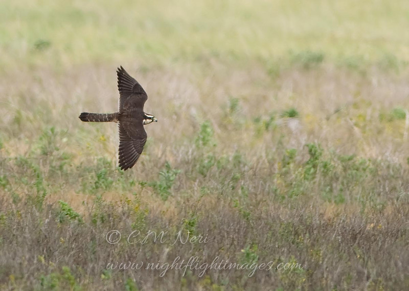"""Aplomodo Falcon © 2009 C. M. Neri.  Laguna Atascosa NWR, TX APFAHYFL2  <div class=""""ss-paypal-button""""><div class=""""ss-paypal-add-to-cart-section""""><div class=""""ss-paypal-product-options""""><h4>Mat Sizes</h4><ul><li><a href=""""https://www.paypal.com/cgi-bin/webscr?cmd=_cart&business=T77V5VKCW4K2U&lc=US&item_name=Aplomodo%20Falcon%20%C2%A9%202009%20C.%20M.%20Neri.%20%20Laguna%20Atascosa%20NWR%2C%20TX%20APFAHYFL2&item_number=http%3A%2F%2Fwww.nightflightimages.com%2FGalleries-1%2FHawks%2Fi-qWStsGL&button_subtype=products&no_note=0&cn=Add%20special%20instructions%20to%20the%20seller%3A&no_shipping=2&currency_code=USD&weight_unit=lbs&add=1&bn=PP-ShopCartBF%3Abtn_cart_SM.gif%3ANonHosted&on0=Mat%20Sizes&option_select0=5%20x%207&option_amount0=10.00&option_select1=8%20x%2010&option_amount1=18.00&option_select2=11%20x%2014&option_amount2=28.00&option_select3=card&option_amount3=4.00&option_index=0&charset=utf-8&submit=&os0=5%20x%207"""" target=""""paypal""""><span>5 x 7 $11.00 USD</span><img src=""""https://www.paypalobjects.com/en_US/i/btn/btn_cart_SM.gif""""></a></li><li><a href=""""https://www.paypal.com/cgi-bin/webscr?cmd=_cart&business=T77V5VKCW4K2U&lc=US&item_name=Aplomodo%20Falcon%20%C2%A9%202009%20C.%20M.%20Neri.%20%20Laguna%20Atascosa%20NWR%2C%20TX%20APFAHYFL2&item_number=http%3A%2F%2Fwww.nightflightimages.com%2FGalleries-1%2FHawks%2Fi-qWStsGL&button_subtype=products&no_note=0&cn=Add%20special%20instructions%20to%20the%20seller%3A&no_shipping=2&currency_code=USD&weight_unit=lbs&add=1&bn=PP-ShopCartBF%3Abtn_cart_SM.gif%3ANonHosted&on0=Mat%20Sizes&option_select0=5%20x%207&option_amount0=10.00&option_select1=8%20x%2010&option_amount1=18.00&option_select2=11%20x%2014&option_amount2=28.00&option_select3=card&option_amount3=4.00&option_index=0&charset=utf-8&submit=&os0=8%20x%2010"""" target=""""paypal""""><span>8 x 10 $19.00 USD</span><img src=""""https://www.paypalobjects.com/en_US/i/btn/btn_cart_SM.gif""""></a></li><li><a href=""""https://www.paypal.com/cgi-bin/webscr?cmd=_cart&business=T77V5VKCW4K2U&lc=US&item_na"""