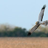 "Northern Harrier © 2010 C. M. Neri.  Laguna Atascosa NWR, TX NOHATX  <div class=""ss-paypal-button""><div class=""ss-paypal-add-to-cart-section""><div class=""ss-paypal-product-options""><h4>Mat Sizes</h4><ul><li><a href=""https://www.paypal.com/cgi-bin/webscr?cmd=_cart&business=T77V5VKCW4K2U&lc=US&item_name=Northern%20Harrier%20%C2%A9%202010%20C.%20M.%20Neri.%20%20Laguna%20Atascosa%20NWR%2C%20TX%20NOHATX&item_number=http%3A%2F%2Fwww.nightflightimages.com%2FGalleries-1%2FHawks%2Fi-sb8krRc&button_subtype=products&no_note=0&cn=Add%20special%20instructions%20to%20the%20seller%3A&no_shipping=2&currency_code=USD&weight_unit=lbs&add=1&bn=PP-ShopCartBF%3Abtn_cart_SM.gif%3ANonHosted&on0=Mat%20Sizes&option_select0=5%20x%207&option_amount0=10.00&option_select1=8%20x%2010&option_amount1=18.00&option_select2=11%20x%2014&option_amount2=28.00&option_select3=card&option_amount3=4.00&option_index=0&charset=utf-8&submit=&os0=5%20x%207"" target=""paypal""><span>5 x 7 $11.00 USD</span><img src=""https://www.paypalobjects.com/en_US/i/btn/btn_cart_SM.gif""></a></li><li><a href=""https://www.paypal.com/cgi-bin/webscr?cmd=_cart&business=T77V5VKCW4K2U&lc=US&item_name=Northern%20Harrier%20%C2%A9%202010%20C.%20M.%20Neri.%20%20Laguna%20Atascosa%20NWR%2C%20TX%20NOHATX&item_number=http%3A%2F%2Fwww.nightflightimages.com%2FGalleries-1%2FHawks%2Fi-sb8krRc&button_subtype=products&no_note=0&cn=Add%20special%20instructions%20to%20the%20seller%3A&no_shipping=2&currency_code=USD&weight_unit=lbs&add=1&bn=PP-ShopCartBF%3Abtn_cart_SM.gif%3ANonHosted&on0=Mat%20Sizes&option_select0=5%20x%207&option_amount0=10.00&option_select1=8%20x%2010&option_amount1=18.00&option_select2=11%20x%2014&option_amount2=28.00&option_select3=card&option_amount3=4.00&option_index=0&charset=utf-8&submit=&os0=8%20x%2010"" target=""paypal""><span>8 x 10 $19.00 USD</span><img src=""https://www.paypalobjects.com/en_US/i/btn/btn_cart_SM.gif""></a></li><li><a href=""https://www.paypal.com/cgi-bin/webscr?cmd=_cart&business=T77V5VKCW4K2U&lc=US&item_name=Northern%20Harrier%20%C2%A9%202010%20C.%20M.%20Neri.%20%20Laguna%20Atascosa%20NWR%2C%20TX%20NOHATX&item_number=http%3A%2F%2Fwww.nightflightimages.com%2FGalleries-1%2FHawks%2Fi-sb8krRc&button_subtype=products&no_note=0&cn=Add%20special%20instructions%20to%20the%20seller%3A&no_shipping=2&currency_code=USD&weight_unit=lbs&add=1&bn=PP-ShopCartBF%3Abtn_cart_SM.gif%3ANonHosted&on0=Mat%20Sizes&option_select0=5%20x%207&option_amount0=10.00&option_select1=8%20x%2010&option_amount1=18.00&option_select2=11%20x%2014&option_amount2=28.00&option_select3=card&option_amount3=4.00&option_index=0&charset=utf-8&submit=&os0=11%20x%2014"" target=""paypal""><span>11 x 14 $29.00 USD</span><img src=""https://www.paypalobjects.com/en_US/i/btn/btn_cart_SM.gif""></a></li><li><a href=""https://www.paypal.com/cgi-bin/webscr?cmd=_cart&business=T77V5VKCW4K2U&lc=US&item_name=Northern%20Harrier%20%C2%A9%202010%20C.%20M.%20Neri.%20%20Laguna%20Atascosa%20NWR%2C%20TX%20NOHATX&item_number=http%3A%2F%2Fwww.nightflightimages.com%2FGalleries-1%2FHawks%2Fi-sb8krRc&button_subtype=products&no_note=0&cn=Add%20special%20instructions%20to%20the%20seller%3A&no_shipping=2&currency_code=USD&weight_unit=lbs&add=1&bn=PP-ShopCartBF%3Abtn_cart_SM.gif%3ANonHosted&on0=Mat%20Sizes&option_select0=5%20x%207&option_amount0=10.00&option_select1=8%20x%2010&option_amount1=18.00&option_select2=11%20x%2014&option_amount2=28.00&option_select3=card&option_amount3=4.00&option_index=0&charset=utf-8&submit=&os0=card"" target=""paypal""><span>card $5.00 USD</span><img src=""https://www.paypalobjects.com/en_US/i/btn/btn_cart_SM.gif""></a></li></ul></div></div> <div class=""ss-paypal-view-cart-section""><a href=""https://www.paypal.com/cgi-bin/webscr?cmd=_cart&business=T77V5VKCW4K2U&display=1&item_name=Northern%20Harrier%20%C2%A9%202010%20C.%20M.%20Neri.%20%20Laguna%20Atascosa%20NWR%2C%20TX%20NOHATX&item_number=http%3A%2F%2Fwww.nightflightimages.com%2FGalleries-1%2FHawks%2Fi-sb8krRc&charset=utf-8&submit="" target=""paypal"" class=""ss-paypal-submit-button""><img src=""https://www.paypalobjects.com/en_US/i/btn/btn_viewcart_LG.gif""></a></div></div><div class=""ss-paypal-button-end""></div>"