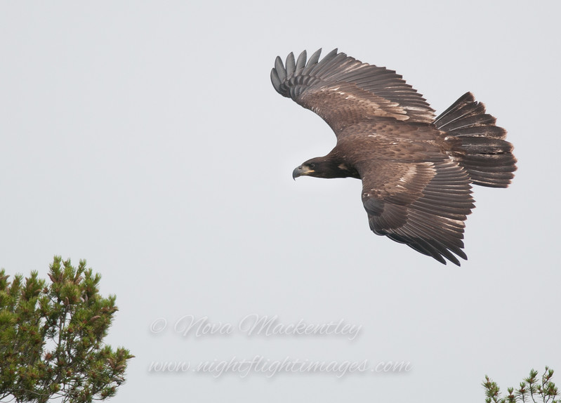 "Bald Eagle landing © 2014 Nova Mackentley Whitefish Point, MI  BEJ  <div class=""ss-paypal-button""><div class=""ss-paypal-add-to-cart-section""><div class=""ss-paypal-product-options""><h4>Mat Sizes</h4><ul><li><a href=""https://www.paypal.com/cgi-bin/webscr?cmd=_cart&business=T77V5VKCW4K2U&lc=US&item_name=Bald%20Eagle%20landing%20%C2%A9%202014%20Nova%20Mackentley%20Whitefish%20Point%2C%20MI%20%20BEJ&item_number=http%3A%2F%2Fwww.nightflightimages.com%2FGalleries-1%2FHawks%2Fi-snNHQ5f&button_subtype=products&no_note=0&cn=Add%20special%20instructions%20to%20the%20seller%3A&no_shipping=2&currency_code=USD&weight_unit=lbs&add=1&bn=PP-ShopCartBF%3Abtn_cart_SM.gif%3ANonHosted&on0=Mat%20Sizes&option_select0=5%20x%207&option_amount0=10.00&option_select1=8%20x%2010&option_amount1=18.00&option_select2=11%20x%2014&option_amount2=28.00&option_select3=card&option_amount3=4.00&option_index=0&charset=utf-8&submit=&os0=5%20x%207"" target=""paypal""><span>5 x 7 $11.00 USD</span><img src=""https://www.paypalobjects.com/en_US/i/btn/btn_cart_SM.gif""></a></li><li><a href=""https://www.paypal.com/cgi-bin/webscr?cmd=_cart&business=T77V5VKCW4K2U&lc=US&item_name=Bald%20Eagle%20landing%20%C2%A9%202014%20Nova%20Mackentley%20Whitefish%20Point%2C%20MI%20%20BEJ&item_number=http%3A%2F%2Fwww.nightflightimages.com%2FGalleries-1%2FHawks%2Fi-snNHQ5f&button_subtype=products&no_note=0&cn=Add%20special%20instructions%20to%20the%20seller%3A&no_shipping=2&currency_code=USD&weight_unit=lbs&add=1&bn=PP-ShopCartBF%3Abtn_cart_SM.gif%3ANonHosted&on0=Mat%20Sizes&option_select0=5%20x%207&option_amount0=10.00&option_select1=8%20x%2010&option_amount1=18.00&option_select2=11%20x%2014&option_amount2=28.00&option_select3=card&option_amount3=4.00&option_index=0&charset=utf-8&submit=&os0=8%20x%2010"" target=""paypal""><span>8 x 10 $19.00 USD</span><img src=""https://www.paypalobjects.com/en_US/i/btn/btn_cart_SM.gif""></a></li><li><a href=""https://www.paypal.com/cgi-bin/webscr?cmd=_cart&business=T77V5VKCW4K2U&lc=US&item_name=Bald%20Eagle%20landing%20%C2%A9%202014%20Nova%20Mackentley%20Whitefish%20Point%2C%20MI%20%20BEJ&item_number=http%3A%2F%2Fwww.nightflightimages.com%2FGalleries-1%2FHawks%2Fi-snNHQ5f&button_subtype=products&no_note=0&cn=Add%20special%20instructions%20to%20the%20seller%3A&no_shipping=2&currency_code=USD&weight_unit=lbs&add=1&bn=PP-ShopCartBF%3Abtn_cart_SM.gif%3ANonHosted&on0=Mat%20Sizes&option_select0=5%20x%207&option_amount0=10.00&option_select1=8%20x%2010&option_amount1=18.00&option_select2=11%20x%2014&option_amount2=28.00&option_select3=card&option_amount3=4.00&option_index=0&charset=utf-8&submit=&os0=11%20x%2014"" target=""paypal""><span>11 x 14 $29.00 USD</span><img src=""https://www.paypalobjects.com/en_US/i/btn/btn_cart_SM.gif""></a></li><li><a href=""https://www.paypal.com/cgi-bin/webscr?cmd=_cart&business=T77V5VKCW4K2U&lc=US&item_name=Bald%20Eagle%20landing%20%C2%A9%202014%20Nova%20Mackentley%20Whitefish%20Point%2C%20MI%20%20BEJ&item_number=http%3A%2F%2Fwww.nightflightimages.com%2FGalleries-1%2FHawks%2Fi-snNHQ5f&button_subtype=products&no_note=0&cn=Add%20special%20instructions%20to%20the%20seller%3A&no_shipping=2&currency_code=USD&weight_unit=lbs&add=1&bn=PP-ShopCartBF%3Abtn_cart_SM.gif%3ANonHosted&on0=Mat%20Sizes&option_select0=5%20x%207&option_amount0=10.00&option_select1=8%20x%2010&option_amount1=18.00&option_select2=11%20x%2014&option_amount2=28.00&option_select3=card&option_amount3=4.00&option_index=0&charset=utf-8&submit=&os0=card"" target=""paypal""><span>card $5.00 USD</span><img src=""https://www.paypalobjects.com/en_US/i/btn/btn_cart_SM.gif""></a></li></ul></div></div> <div class=""ss-paypal-view-cart-section""><a href=""https://www.paypal.com/cgi-bin/webscr?cmd=_cart&business=T77V5VKCW4K2U&display=1&item_name=Bald%20Eagle%20landing%20%C2%A9%202014%20Nova%20Mackentley%20Whitefish%20Point%2C%20MI%20%20BEJ&item_number=http%3A%2F%2Fwww.nightflightimages.com%2FGalleries-1%2FHawks%2Fi-snNHQ5f&charset=utf-8&submit="" target=""paypal"" class=""ss-paypal-submit-button""><img src=""https://www.paypalobjects.com/en_US/i/btn/btn_viewcart_LG.gif""></a></div></div><div class=""ss-paypal-button-end""></div>"