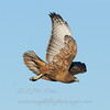"Red-tailed Hawk © 2010 C. M. Neri Bosque Del Apache, NM RTHANM  <div class=""ss-paypal-button""><div class=""ss-paypal-add-to-cart-section""><div class=""ss-paypal-product-options""><h4>Mat Sizes</h4><ul><li><a href=""https://www.paypal.com/cgi-bin/webscr?cmd=_cart&amp;business=T77V5VKCW4K2U&amp;lc=US&amp;item_name=Red-tailed%20Hawk%20%C2%A9%202010%20C.%20M.%20Neri%20Bosque%20Del%20Apache%2C%20NM%20RTHANM&amp;item_number=http%3A%2F%2Fwww.nightflightimages.com%2FGalleries-1%2FTravels%2Fi-snVMrgx&amp;button_subtype=products&amp;no_note=0&amp;cn=Add%20special%20instructions%20to%20the%20seller%3A&amp;no_shipping=2&amp;currency_code=USD&amp;weight_unit=lbs&amp;add=1&amp;bn=PP-ShopCartBF%3Abtn_cart_SM.gif%3ANonHosted&amp;on0=Mat%20Sizes&amp;option_select0=5%20x%207&amp;option_amount0=10.00&amp;option_select1=8%20x%2010&amp;option_amount1=18.00&amp;option_select2=11%20x%2014&amp;option_amount2=28.00&amp;option_select3=card&amp;option_amount3=4.00&amp;option_index=0&amp;charset=utf-8&amp;submit=&amp;os0=5%20x%207"" target=""paypal""><span>5 x 7 $11.00 USD</span><img src=""https://www.paypalobjects.com/en_US/i/btn/btn_cart_SM.gif""></a></li><li><a href=""https://www.paypal.com/cgi-bin/webscr?cmd=_cart&amp;business=T77V5VKCW4K2U&amp;lc=US&amp;item_name=Red-tailed%20Hawk%20%C2%A9%202010%20C.%20M.%20Neri%20Bosque%20Del%20Apache%2C%20NM%20RTHANM&amp;item_number=http%3A%2F%2Fwww.nightflightimages.com%2FGalleries-1%2FTravels%2Fi-snVMrgx&amp;button_subtype=products&amp;no_note=0&amp;cn=Add%20special%20instructions%20to%20the%20seller%3A&amp;no_shipping=2&amp;currency_code=USD&amp;weight_unit=lbs&amp;add=1&amp;bn=PP-ShopCartBF%3Abtn_cart_SM.gif%3ANonHosted&amp;on0=Mat%20Sizes&amp;option_select0=5%20x%207&amp;option_amount0=10.00&amp;option_select1=8%20x%2010&amp;option_amount1=18.00&amp;option_select2=11%20x%2014&amp;option_amount2=28.00&amp;option_select3=card&amp;option_amount3=4.00&amp;option_index=0&amp;charset=utf-8&amp;submit=&amp;os0=8%20x%2010"" target=""paypal""><span>8 x 10 $19.00 USD</span><img src=""https://www.paypalobjects.com/en_US/i/btn/btn_cart_SM.gif""></a></li><li><a href=""https://www.paypal.com/cgi-bin/webscr?cmd=_cart&amp;business=T77V5VKCW4K2U&amp;lc=US&amp;item_name=Red-tailed%20Hawk%20%C2%A9%202010%20C.%20M.%20Neri%20Bosque%20Del%20Apache%2C%20NM%20RTHANM&amp;item_number=http%3A%2F%2Fwww.nightflightimages.com%2FGalleries-1%2FTravels%2Fi-snVMrgx&amp;button_subtype=products&amp;no_note=0&amp;cn=Add%20special%20instructions%20to%20the%20seller%3A&amp;no_shipping=2&amp;currency_code=USD&amp;weight_unit=lbs&amp;add=1&amp;bn=PP-ShopCartBF%3Abtn_cart_SM.gif%3ANonHosted&amp;on0=Mat%20Sizes&amp;option_select0=5%20x%207&amp;option_amount0=10.00&amp;option_select1=8%20x%2010&amp;option_amount1=18.00&amp;option_select2=11%20x%2014&amp;option_amount2=28.00&amp;option_select3=card&amp;option_amount3=4.00&amp;option_index=0&amp;charset=utf-8&amp;submit=&amp;os0=11%20x%2014"" target=""paypal""><span>11 x 14 $29.00 USD</span><img src=""https://www.paypalobjects.com/en_US/i/btn/btn_cart_SM.gif""></a></li><li><a href=""https://www.paypal.com/cgi-bin/webscr?cmd=_cart&amp;business=T77V5VKCW4K2U&amp;lc=US&amp;item_name=Red-tailed%20Hawk%20%C2%A9%202010%20C.%20M.%20Neri%20Bosque%20Del%20Apache%2C%20NM%20RTHANM&amp;item_number=http%3A%2F%2Fwww.nightflightimages.com%2FGalleries-1%2FTravels%2Fi-snVMrgx&amp;button_subtype=products&amp;no_note=0&amp;cn=Add%20special%20instructions%20to%20the%20seller%3A&amp;no_shipping=2&amp;currency_code=USD&amp;weight_unit=lbs&amp;add=1&amp;bn=PP-ShopCartBF%3Abtn_cart_SM.gif%3ANonHosted&amp;on0=Mat%20Sizes&amp;option_select0=5%20x%207&amp;option_amount0=10.00&amp;option_select1=8%20x%2010&amp;option_amount1=18.00&amp;option_select2=11%20x%2014&amp;option_amount2=28.00&amp;option_select3=card&amp;option_amount3=4.00&amp;option_index=0&amp;charset=utf-8&amp;submit=&amp;os0=card"" target=""paypal""><span>card $5.00 USD</span><img src=""https://www.paypalobjects.com/en_US/i/btn/btn_cart_SM.gif""></a></li></ul></div></div> <div class=""ss-paypal-view-cart-section""><a href=""https://www.paypal.com/cgi-bin/webscr?cmd=_cart&amp;business=T77V5VKCW4K2U&amp;display=1&amp;item_name=Red-tailed%20Hawk%20%C2%A9%202010%20C.%20M.%20Neri%20Bosque%20Del%20Apache%2C%20NM%20RTHANM&amp;item_number=http%3A%2F%2Fwww.nightflightimages.com%2FGalleries-1%2FTravels%2Fi-snVMrgx&amp;charset=utf-8&amp;submit="" target=""paypal"" class=""ss-paypal-submit-button""><img src=""https://www.paypalobjects.com/en_US/i/btn/btn_viewcart_LG.gif""></a></div></div><div class=""ss-paypal-button-end""></div>"