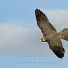 "Peregrine Falcon © 2007 Nova Mackentley Cape May, NJ PEF  <div class=""ss-paypal-button""><div class=""ss-paypal-add-to-cart-section""><div class=""ss-paypal-product-options""><h4>Mat Sizes</h4><ul><li><a href=""https://www.paypal.com/cgi-bin/webscr?cmd=_cart&amp;business=T77V5VKCW4K2U&amp;lc=US&amp;item_name=Peregrine%20Falcon%20%C2%A9%202007%20Nova%20Mackentley%20Cape%20May%2C%20NJ%20PEF&amp;item_number=http%3A%2F%2Fwww.nightflightimages.com%2FGalleries-1%2FHawks%2Fi-t38bC2Z&amp;button_subtype=products&amp;no_note=0&amp;cn=Add%20special%20instructions%20to%20the%20seller%3A&amp;no_shipping=2&amp;currency_code=USD&amp;weight_unit=lbs&amp;add=1&amp;bn=PP-ShopCartBF%3Abtn_cart_SM.gif%3ANonHosted&amp;on0=Mat%20Sizes&amp;option_select0=5%20x%207&amp;option_amount0=10.00&amp;option_select1=8%20x%2010&amp;option_amount1=18.00&amp;option_select2=11%20x%2014&amp;option_amount2=28.00&amp;option_select3=card&amp;option_amount3=4.00&amp;option_index=0&amp;charset=utf-8&amp;submit=&amp;os0=5%20x%207"" target=""paypal""><span>5 x 7 $11.00 USD</span><img src=""https://www.paypalobjects.com/en_US/i/btn/btn_cart_SM.gif""></a></li><li><a href=""https://www.paypal.com/cgi-bin/webscr?cmd=_cart&amp;business=T77V5VKCW4K2U&amp;lc=US&amp;item_name=Peregrine%20Falcon%20%C2%A9%202007%20Nova%20Mackentley%20Cape%20May%2C%20NJ%20PEF&amp;item_number=http%3A%2F%2Fwww.nightflightimages.com%2FGalleries-1%2FHawks%2Fi-t38bC2Z&amp;button_subtype=products&amp;no_note=0&amp;cn=Add%20special%20instructions%20to%20the%20seller%3A&amp;no_shipping=2&amp;currency_code=USD&amp;weight_unit=lbs&amp;add=1&amp;bn=PP-ShopCartBF%3Abtn_cart_SM.gif%3ANonHosted&amp;on0=Mat%20Sizes&amp;option_select0=5%20x%207&amp;option_amount0=10.00&amp;option_select1=8%20x%2010&amp;option_amount1=18.00&amp;option_select2=11%20x%2014&amp;option_amount2=28.00&amp;option_select3=card&amp;option_amount3=4.00&amp;option_index=0&amp;charset=utf-8&amp;submit=&amp;os0=8%20x%2010"" target=""paypal""><span>8 x 10 $19.00 USD</span><img src=""https://www.paypalobjects.com/en_US/i/btn/btn_cart_SM.gif""></a></li><li><a href=""https://www.paypal.com/cgi-bin/webscr?cmd=_cart&amp;business=T77V5VKCW4K2U&amp;lc=US&amp;item_name=Peregrine%20Falcon%20%C2%A9%202007%20Nova%20Mackentley%20Cape%20May%2C%20NJ%20PEF&amp;item_number=http%3A%2F%2Fwww.nightflightimages.com%2FGalleries-1%2FHawks%2Fi-t38bC2Z&amp;button_subtype=products&amp;no_note=0&amp;cn=Add%20special%20instructions%20to%20the%20seller%3A&amp;no_shipping=2&amp;currency_code=USD&amp;weight_unit=lbs&amp;add=1&amp;bn=PP-ShopCartBF%3Abtn_cart_SM.gif%3ANonHosted&amp;on0=Mat%20Sizes&amp;option_select0=5%20x%207&amp;option_amount0=10.00&amp;option_select1=8%20x%2010&amp;option_amount1=18.00&amp;option_select2=11%20x%2014&amp;option_amount2=28.00&amp;option_select3=card&amp;option_amount3=4.00&amp;option_index=0&amp;charset=utf-8&amp;submit=&amp;os0=11%20x%2014"" target=""paypal""><span>11 x 14 $29.00 USD</span><img src=""https://www.paypalobjects.com/en_US/i/btn/btn_cart_SM.gif""></a></li><li><a href=""https://www.paypal.com/cgi-bin/webscr?cmd=_cart&amp;business=T77V5VKCW4K2U&amp;lc=US&amp;item_name=Peregrine%20Falcon%20%C2%A9%202007%20Nova%20Mackentley%20Cape%20May%2C%20NJ%20PEF&amp;item_number=http%3A%2F%2Fwww.nightflightimages.com%2FGalleries-1%2FHawks%2Fi-t38bC2Z&amp;button_subtype=products&amp;no_note=0&amp;cn=Add%20special%20instructions%20to%20the%20seller%3A&amp;no_shipping=2&amp;currency_code=USD&amp;weight_unit=lbs&amp;add=1&amp;bn=PP-ShopCartBF%3Abtn_cart_SM.gif%3ANonHosted&amp;on0=Mat%20Sizes&amp;option_select0=5%20x%207&amp;option_amount0=10.00&amp;option_select1=8%20x%2010&amp;option_amount1=18.00&amp;option_select2=11%20x%2014&amp;option_amount2=28.00&amp;option_select3=card&amp;option_amount3=4.00&amp;option_index=0&amp;charset=utf-8&amp;submit=&amp;os0=card"" target=""paypal""><span>card $5.00 USD</span><img src=""https://www.paypalobjects.com/en_US/i/btn/btn_cart_SM.gif""></a></li></ul></div></div> <div class=""ss-paypal-view-cart-section""><a href=""https://www.paypal.com/cgi-bin/webscr?cmd=_cart&amp;business=T77V5VKCW4K2U&amp;display=1&amp;item_name=Peregrine%20Falcon%20%C2%A9%202007%20Nova%20Mackentley%20Cape%20May%2C%20NJ%20PEF&amp;item_number=http%3A%2F%2Fwww.nightflightimages.com%2FGalleries-1%2FHawks%2Fi-t38bC2Z&amp;charset=utf-8&amp;submit="" target=""paypal"" class=""ss-paypal-submit-button""><img src=""https://www.paypalobjects.com/en_US/i/btn/btn_viewcart_LG.gif""></a></div></div><div class=""ss-paypal-button-end""></div>"