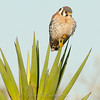 "American Kestrel on Yucca © 2010 Nova Mackentley Laguna Atascosa NWR, TX AKY  <div class=""ss-paypal-button""><div class=""ss-paypal-add-to-cart-section""><div class=""ss-paypal-product-options""><h4>Mat Sizes</h4><ul><li><a href=""https://www.paypal.com/cgi-bin/webscr?cmd=_cart&business=T77V5VKCW4K2U&lc=US&item_name=American%20Kestrel%20on%20Yucca%20%C2%A9%202010%20Nova%20Mackentley%20Laguna%20Atascosa%20NWR%2C%20TX%20AKY&item_number=http%3A%2F%2Fwww.nightflightimages.com%2FGalleries-1%2FHawks%2Fi-wcTkgnn&button_subtype=products&no_note=0&cn=Add%20special%20instructions%20to%20the%20seller%3A&no_shipping=2&currency_code=USD&weight_unit=lbs&add=1&bn=PP-ShopCartBF%3Abtn_cart_SM.gif%3ANonHosted&on0=Mat%20Sizes&option_select0=5%20x%207&option_amount0=10.00&option_select1=8%20x%2010&option_amount1=18.00&option_select2=11%20x%2014&option_amount2=28.00&option_select3=card&option_amount3=4.00&option_index=0&charset=utf-8&submit=&os0=5%20x%207"" target=""paypal""><span>5 x 7 $11.00 USD</span><img src=""https://www.paypalobjects.com/en_US/i/btn/btn_cart_SM.gif""></a></li><li><a href=""https://www.paypal.com/cgi-bin/webscr?cmd=_cart&business=T77V5VKCW4K2U&lc=US&item_name=American%20Kestrel%20on%20Yucca%20%C2%A9%202010%20Nova%20Mackentley%20Laguna%20Atascosa%20NWR%2C%20TX%20AKY&item_number=http%3A%2F%2Fwww.nightflightimages.com%2FGalleries-1%2FHawks%2Fi-wcTkgnn&button_subtype=products&no_note=0&cn=Add%20special%20instructions%20to%20the%20seller%3A&no_shipping=2&currency_code=USD&weight_unit=lbs&add=1&bn=PP-ShopCartBF%3Abtn_cart_SM.gif%3ANonHosted&on0=Mat%20Sizes&option_select0=5%20x%207&option_amount0=10.00&option_select1=8%20x%2010&option_amount1=18.00&option_select2=11%20x%2014&option_amount2=28.00&option_select3=card&option_amount3=4.00&option_index=0&charset=utf-8&submit=&os0=8%20x%2010"" target=""paypal""><span>8 x 10 $19.00 USD</span><img src=""https://www.paypalobjects.com/en_US/i/btn/btn_cart_SM.gif""></a></li><li><a href=""https://www.paypal.com/cgi-bin/webscr?cmd=_cart&business=T77V5VKCW4K2U&lc=US&item_name=American%20Kestrel%20on%20Yucca%20%C2%A9%202010%20Nova%20Mackentley%20Laguna%20Atascosa%20NWR%2C%20TX%20AKY&item_number=http%3A%2F%2Fwww.nightflightimages.com%2FGalleries-1%2FHawks%2Fi-wcTkgnn&button_subtype=products&no_note=0&cn=Add%20special%20instructions%20to%20the%20seller%3A&no_shipping=2&currency_code=USD&weight_unit=lbs&add=1&bn=PP-ShopCartBF%3Abtn_cart_SM.gif%3ANonHosted&on0=Mat%20Sizes&option_select0=5%20x%207&option_amount0=10.00&option_select1=8%20x%2010&option_amount1=18.00&option_select2=11%20x%2014&option_amount2=28.00&option_select3=card&option_amount3=4.00&option_index=0&charset=utf-8&submit=&os0=11%20x%2014"" target=""paypal""><span>11 x 14 $29.00 USD</span><img src=""https://www.paypalobjects.com/en_US/i/btn/btn_cart_SM.gif""></a></li><li><a href=""https://www.paypal.com/cgi-bin/webscr?cmd=_cart&business=T77V5VKCW4K2U&lc=US&item_name=American%20Kestrel%20on%20Yucca%20%C2%A9%202010%20Nova%20Mackentley%20Laguna%20Atascosa%20NWR%2C%20TX%20AKY&item_number=http%3A%2F%2Fwww.nightflightimages.com%2FGalleries-1%2FHawks%2Fi-wcTkgnn&button_subtype=products&no_note=0&cn=Add%20special%20instructions%20to%20the%20seller%3A&no_shipping=2&currency_code=USD&weight_unit=lbs&add=1&bn=PP-ShopCartBF%3Abtn_cart_SM.gif%3ANonHosted&on0=Mat%20Sizes&option_select0=5%20x%207&option_amount0=10.00&option_select1=8%20x%2010&option_amount1=18.00&option_select2=11%20x%2014&option_amount2=28.00&option_select3=card&option_amount3=4.00&option_index=0&charset=utf-8&submit=&os0=card"" target=""paypal""><span>card $5.00 USD</span><img src=""https://www.paypalobjects.com/en_US/i/btn/btn_cart_SM.gif""></a></li></ul></div></div> <div class=""ss-paypal-view-cart-section""><a href=""https://www.paypal.com/cgi-bin/webscr?cmd=_cart&business=T77V5VKCW4K2U&display=1&item_name=American%20Kestrel%20on%20Yucca%20%C2%A9%202010%20Nova%20Mackentley%20Laguna%20Atascosa%20NWR%2C%20TX%20AKY&item_number=http%3A%2F%2Fwww.nightflightimages.com%2FGalleries-1%2FHawks%2Fi-wcTkgnn&charset=utf-8&submit="" target=""paypal"" class=""ss-paypal-submit-button""><img src=""https://www.paypalobjects.com/en_US/i/btn/btn_viewcart_LG.gif""></a></div></div><div class=""ss-paypal-button-end""></div>"