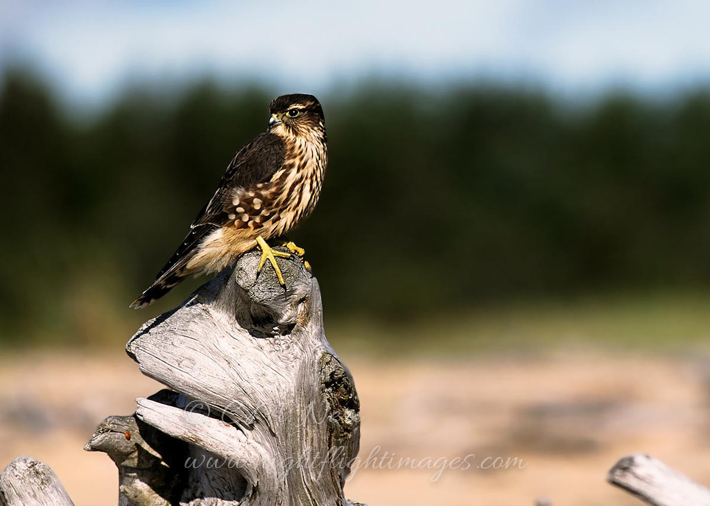 """Merlin on driftwood © 2004 Chris M. Neri. Whitefish Point, MI  <div class=""""ss-paypal-button""""><div class=""""ss-paypal-add-to-cart-section""""><div class=""""ss-paypal-product-options""""><h4>Mat Sizes</h4><ul><li><a href=""""https://www.paypal.com/cgi-bin/webscr?cmd=_cart&business=T77V5VKCW4K2U&lc=US&item_name=Merlin%20on%20driftwood%20%C2%A9%202004%20Chris%20M.%20Neri.%20Whitefish%20Point%2C%20MI&item_number=http%3A%2F%2Fwww.nightflightimages.com%2FGalleries-1%2FHawks%2Fi-xmB78fC&button_subtype=products&no_note=0&cn=Add%20special%20instructions%20to%20the%20seller%3A&no_shipping=2&currency_code=USD&weight_unit=lbs&add=1&bn=PP-ShopCartBF%3Abtn_cart_SM.gif%3ANonHosted&on0=Mat%20Sizes&option_select0=5%20x%207&option_amount0=10.00&option_select1=8%20x%2010&option_amount1=18.00&option_select2=11%20x%2014&option_amount2=28.00&option_select3=card&option_amount3=4.00&option_index=0&charset=utf-8&submit=&os0=5%20x%207"""" target=""""paypal""""><span>5 x 7 $11.00 USD</span><img src=""""https://www.paypalobjects.com/en_US/i/btn/btn_cart_SM.gif""""></a></li><li><a href=""""https://www.paypal.com/cgi-bin/webscr?cmd=_cart&business=T77V5VKCW4K2U&lc=US&item_name=Merlin%20on%20driftwood%20%C2%A9%202004%20Chris%20M.%20Neri.%20Whitefish%20Point%2C%20MI&item_number=http%3A%2F%2Fwww.nightflightimages.com%2FGalleries-1%2FHawks%2Fi-xmB78fC&button_subtype=products&no_note=0&cn=Add%20special%20instructions%20to%20the%20seller%3A&no_shipping=2&currency_code=USD&weight_unit=lbs&add=1&bn=PP-ShopCartBF%3Abtn_cart_SM.gif%3ANonHosted&on0=Mat%20Sizes&option_select0=5%20x%207&option_amount0=10.00&option_select1=8%20x%2010&option_amount1=18.00&option_select2=11%20x%2014&option_amount2=28.00&option_select3=card&option_amount3=4.00&option_index=0&charset=utf-8&submit=&os0=8%20x%2010"""" target=""""paypal""""><span>8 x 10 $19.00 USD</span><img src=""""https://www.paypalobjects.com/en_US/i/btn/btn_cart_SM.gif""""></a></li><li><a href=""""https://www.paypal.com/cgi-bin/webscr?cmd=_cart&business=T77V5VKCW4K2U&lc=US&item_name=Merlin%20on%20driftwood%20%C2"""
